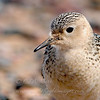 "Buff-breasted Sandpiper © 2008 C. M. Neri. Whitefish Point, MI BBSAHS  <div class=""ss-paypal-button""><div class=""ss-paypal-add-to-cart-section""><div class=""ss-paypal-product-options""><h4>Mat Sizes</h4><ul><li><a href=""https://www.paypal.com/cgi-bin/webscr?cmd=_cart&business=T77V5VKCW4K2U&lc=US&item_name=Buff-breasted%20Sandpiper%20%C2%A9%202008%20C.%20M.%20Neri.%20Whitefish%20Point%2C%20MI%20BBSAHS&item_number=http%3A%2F%2Fwww.nightflightimages.com%2FGalleries-1%2FShore%2Fi-ztzTsZZ&button_subtype=products&no_note=0&cn=Add%20special%20instructions%20to%20the%20seller%3A&no_shipping=2&currency_code=USD&weight_unit=lbs&add=1&bn=PP-ShopCartBF%3Abtn_cart_SM.gif%3ANonHosted&on0=Mat%20Sizes&option_select0=5%20x%207&option_amount0=10.00&option_select1=8%20x%2010&option_amount1=18.00&option_select2=11%20x%2014&option_amount2=28.00&option_select3=card&option_amount3=4.00&option_index=0&charset=utf-8&submit=&os0=5%20x%207"" target=""paypal""><span>5 x 7 $11.00 USD</span><img src=""https://www.paypalobjects.com/en_US/i/btn/btn_cart_SM.gif""></a></li><li><a href=""https://www.paypal.com/cgi-bin/webscr?cmd=_cart&business=T77V5VKCW4K2U&lc=US&item_name=Buff-breasted%20Sandpiper%20%C2%A9%202008%20C.%20M.%20Neri.%20Whitefish%20Point%2C%20MI%20BBSAHS&item_number=http%3A%2F%2Fwww.nightflightimages.com%2FGalleries-1%2FShore%2Fi-ztzTsZZ&button_subtype=products&no_note=0&cn=Add%20special%20instructions%20to%20the%20seller%3A&no_shipping=2&currency_code=USD&weight_unit=lbs&add=1&bn=PP-ShopCartBF%3Abtn_cart_SM.gif%3ANonHosted&on0=Mat%20Sizes&option_select0=5%20x%207&option_amount0=10.00&option_select1=8%20x%2010&option_amount1=18.00&option_select2=11%20x%2014&option_amount2=28.00&option_select3=card&option_amount3=4.00&option_index=0&charset=utf-8&submit=&os0=8%20x%2010"" target=""paypal""><span>8 x 10 $19.00 USD</span><img src=""https://www.paypalobjects.com/en_US/i/btn/btn_cart_SM.gif""></a></li><li><a href=""https://www.paypal.com/cgi-bin/webscr?cmd=_cart&business=T77V5VKCW4K2U&lc=US&item_name=Buff-breasted%20Sandpiper%20%C2%A9%202008%20C.%20M.%20Neri.%20Whitefish%20Point%2C%20MI%20BBSAHS&item_number=http%3A%2F%2Fwww.nightflightimages.com%2FGalleries-1%2FShore%2Fi-ztzTsZZ&button_subtype=products&no_note=0&cn=Add%20special%20instructions%20to%20the%20seller%3A&no_shipping=2&currency_code=USD&weight_unit=lbs&add=1&bn=PP-ShopCartBF%3Abtn_cart_SM.gif%3ANonHosted&on0=Mat%20Sizes&option_select0=5%20x%207&option_amount0=10.00&option_select1=8%20x%2010&option_amount1=18.00&option_select2=11%20x%2014&option_amount2=28.00&option_select3=card&option_amount3=4.00&option_index=0&charset=utf-8&submit=&os0=11%20x%2014"" target=""paypal""><span>11 x 14 $29.00 USD</span><img src=""https://www.paypalobjects.com/en_US/i/btn/btn_cart_SM.gif""></a></li><li><a href=""https://www.paypal.com/cgi-bin/webscr?cmd=_cart&business=T77V5VKCW4K2U&lc=US&item_name=Buff-breasted%20Sandpiper%20%C2%A9%202008%20C.%20M.%20Neri.%20Whitefish%20Point%2C%20MI%20BBSAHS&item_number=http%3A%2F%2Fwww.nightflightimages.com%2FGalleries-1%2FShore%2Fi-ztzTsZZ&button_subtype=products&no_note=0&cn=Add%20special%20instructions%20to%20the%20seller%3A&no_shipping=2&currency_code=USD&weight_unit=lbs&add=1&bn=PP-ShopCartBF%3Abtn_cart_SM.gif%3ANonHosted&on0=Mat%20Sizes&option_select0=5%20x%207&option_amount0=10.00&option_select1=8%20x%2010&option_amount1=18.00&option_select2=11%20x%2014&option_amount2=28.00&option_select3=card&option_amount3=4.00&option_index=0&charset=utf-8&submit=&os0=card"" target=""paypal""><span>card $5.00 USD</span><img src=""https://www.paypalobjects.com/en_US/i/btn/btn_cart_SM.gif""></a></li></ul></div></div> <div class=""ss-paypal-view-cart-section""><a href=""https://www.paypal.com/cgi-bin/webscr?cmd=_cart&business=T77V5VKCW4K2U&display=1&item_name=Buff-breasted%20Sandpiper%20%C2%A9%202008%20C.%20M.%20Neri.%20Whitefish%20Point%2C%20MI%20BBSAHS&item_number=http%3A%2F%2Fwww.nightflightimages.com%2FGalleries-1%2FShore%2Fi-ztzTsZZ&charset=utf-8&submit="" target=""paypal"" class=""ss-paypal-submit-button""><img src=""https://www.paypalobjects.com/en_US/i/btn/btn_viewcart_LG.gif""></a></div></div><div class=""ss-paypal-button-end""></div>"