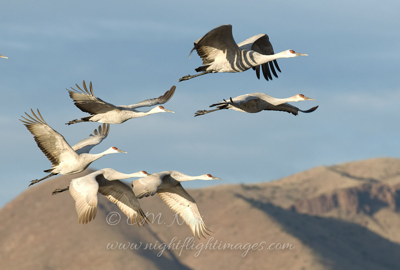 "Sandhill Crane  © 2011 C. M. Neri Bosque Del Apache NWR, NM SACRNM  <div class=""ss-paypal-button""><div class=""ss-paypal-add-to-cart-section""><div class=""ss-paypal-product-options""><h4>Mat Sizes</h4><ul><li><a href=""https://www.paypal.com/cgi-bin/webscr?cmd=_cart&amp;business=T77V5VKCW4K2U&amp;lc=US&amp;item_name=Sandhill%20Crane%20%20%C2%A9%202011%20C.%20M.%20Neri%20Bosque%20Del%20Apache%20NWR%2C%20NM%20SACRNM&amp;item_number=http%3A%2F%2Fwww.nightflightimages.com%2FGalleries-1%2FTravels%2Fi-2m4D55S&amp;button_subtype=products&amp;no_note=0&amp;cn=Add%20special%20instructions%20to%20the%20seller%3A&amp;no_shipping=2&amp;currency_code=USD&amp;weight_unit=lbs&amp;add=1&amp;bn=PP-ShopCartBF%3Abtn_cart_SM.gif%3ANonHosted&amp;on0=Mat%20Sizes&amp;option_select0=5%20x%207&amp;option_amount0=10.00&amp;option_select1=8%20x%2010&amp;option_amount1=18.00&amp;option_select2=11%20x%2014&amp;option_amount2=28.00&amp;option_select3=card&amp;option_amount3=4.00&amp;option_index=0&amp;charset=utf-8&amp;submit=&amp;os0=5%20x%207"" target=""paypal""><span>5 x 7 $11.00 USD</span><img src=""https://www.paypalobjects.com/en_US/i/btn/btn_cart_SM.gif""></a></li><li><a href=""https://www.paypal.com/cgi-bin/webscr?cmd=_cart&amp;business=T77V5VKCW4K2U&amp;lc=US&amp;item_name=Sandhill%20Crane%20%20%C2%A9%202011%20C.%20M.%20Neri%20Bosque%20Del%20Apache%20NWR%2C%20NM%20SACRNM&amp;item_number=http%3A%2F%2Fwww.nightflightimages.com%2FGalleries-1%2FTravels%2Fi-2m4D55S&amp;button_subtype=products&amp;no_note=0&amp;cn=Add%20special%20instructions%20to%20the%20seller%3A&amp;no_shipping=2&amp;currency_code=USD&amp;weight_unit=lbs&amp;add=1&amp;bn=PP-ShopCartBF%3Abtn_cart_SM.gif%3ANonHosted&amp;on0=Mat%20Sizes&amp;option_select0=5%20x%207&amp;option_amount0=10.00&amp;option_select1=8%20x%2010&amp;option_amount1=18.00&amp;option_select2=11%20x%2014&amp;option_amount2=28.00&amp;option_select3=card&amp;option_amount3=4.00&amp;option_index=0&amp;charset=utf-8&amp;submit=&amp;os0=8%20x%2010"" target=""paypal""><span>8 x 10 $19.00 USD</span><img src=""https://www.paypalobjects.com/en_US/i/btn/btn_cart_SM.gif""></a></li><li><a href=""https://www.paypal.com/cgi-bin/webscr?cmd=_cart&amp;business=T77V5VKCW4K2U&amp;lc=US&amp;item_name=Sandhill%20Crane%20%20%C2%A9%202011%20C.%20M.%20Neri%20Bosque%20Del%20Apache%20NWR%2C%20NM%20SACRNM&amp;item_number=http%3A%2F%2Fwww.nightflightimages.com%2FGalleries-1%2FTravels%2Fi-2m4D55S&amp;button_subtype=products&amp;no_note=0&amp;cn=Add%20special%20instructions%20to%20the%20seller%3A&amp;no_shipping=2&amp;currency_code=USD&amp;weight_unit=lbs&amp;add=1&amp;bn=PP-ShopCartBF%3Abtn_cart_SM.gif%3ANonHosted&amp;on0=Mat%20Sizes&amp;option_select0=5%20x%207&amp;option_amount0=10.00&amp;option_select1=8%20x%2010&amp;option_amount1=18.00&amp;option_select2=11%20x%2014&amp;option_amount2=28.00&amp;option_select3=card&amp;option_amount3=4.00&amp;option_index=0&amp;charset=utf-8&amp;submit=&amp;os0=11%20x%2014"" target=""paypal""><span>11 x 14 $29.00 USD</span><img src=""https://www.paypalobjects.com/en_US/i/btn/btn_cart_SM.gif""></a></li><li><a href=""https://www.paypal.com/cgi-bin/webscr?cmd=_cart&amp;business=T77V5VKCW4K2U&amp;lc=US&amp;item_name=Sandhill%20Crane%20%20%C2%A9%202011%20C.%20M.%20Neri%20Bosque%20Del%20Apache%20NWR%2C%20NM%20SACRNM&amp;item_number=http%3A%2F%2Fwww.nightflightimages.com%2FGalleries-1%2FTravels%2Fi-2m4D55S&amp;button_subtype=products&amp;no_note=0&amp;cn=Add%20special%20instructions%20to%20the%20seller%3A&amp;no_shipping=2&amp;currency_code=USD&amp;weight_unit=lbs&amp;add=1&amp;bn=PP-ShopCartBF%3Abtn_cart_SM.gif%3ANonHosted&amp;on0=Mat%20Sizes&amp;option_select0=5%20x%207&amp;option_amount0=10.00&amp;option_select1=8%20x%2010&amp;option_amount1=18.00&amp;option_select2=11%20x%2014&amp;option_amount2=28.00&amp;option_select3=card&amp;option_amount3=4.00&amp;option_index=0&amp;charset=utf-8&amp;submit=&amp;os0=card"" target=""paypal""><span>card $5.00 USD</span><img src=""https://www.paypalobjects.com/en_US/i/btn/btn_cart_SM.gif""></a></li></ul></div></div> <div class=""ss-paypal-view-cart-section""><a href=""https://www.paypal.com/cgi-bin/webscr?cmd=_cart&amp;business=T77V5VKCW4K2U&amp;display=1&amp;item_name=Sandhill%20Crane%20%20%C2%A9%202011%20C.%20M.%20Neri%20Bosque%20Del%20Apache%20NWR%2C%20NM%20SACRNM&amp;item_number=http%3A%2F%2Fwww.nightflightimages.com%2FGalleries-1%2FTravels%2Fi-2m4D55S&amp;charset=utf-8&amp;submit="" target=""paypal"" class=""ss-paypal-submit-button""><img src=""https://www.paypalobjects.com/en_US/i/btn/btn_viewcart_LG.gif""></a></div></div><div class=""ss-paypal-button-end""></div>"