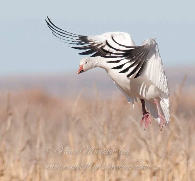 "Snow Goose landing 1 © 2010 Nova Mackentley Bosque del Apache NWR, NM SGW1  <div class=""ss-paypal-button""><div class=""ss-paypal-add-to-cart-section""><div class=""ss-paypal-product-options""><h4>Mat Sizes</h4><ul><li><a href=""https://www.paypal.com/cgi-bin/webscr?cmd=_cart&amp;business=T77V5VKCW4K2U&amp;lc=US&amp;item_name=Snow%20Goose%20landing%201%20%C2%A9%202010%20Nova%20Mackentley%20Bosque%20del%20Apache%20NWR%2C%20NM%20SGW1&amp;item_number=http%3A%2F%2Fwww.nightflightimages.com%2FGalleries-1%2FTravels%2Fi-4CQNc4m&amp;button_subtype=products&amp;no_note=0&amp;cn=Add%20special%20instructions%20to%20the%20seller%3A&amp;no_shipping=2&amp;currency_code=USD&amp;weight_unit=lbs&amp;add=1&amp;bn=PP-ShopCartBF%3Abtn_cart_SM.gif%3ANonHosted&amp;on0=Mat%20Sizes&amp;option_select0=5%20x%207&amp;option_amount0=10.00&amp;option_select1=8%20x%2010&amp;option_amount1=18.00&amp;option_select2=11%20x%2014&amp;option_amount2=28.00&amp;option_select3=card&amp;option_amount3=4.00&amp;option_index=0&amp;charset=utf-8&amp;submit=&amp;os0=5%20x%207"" target=""paypal""><span>5 x 7 $11.00 USD</span><img src=""https://www.paypalobjects.com/en_US/i/btn/btn_cart_SM.gif""></a></li><li><a href=""https://www.paypal.com/cgi-bin/webscr?cmd=_cart&amp;business=T77V5VKCW4K2U&amp;lc=US&amp;item_name=Snow%20Goose%20landing%201%20%C2%A9%202010%20Nova%20Mackentley%20Bosque%20del%20Apache%20NWR%2C%20NM%20SGW1&amp;item_number=http%3A%2F%2Fwww.nightflightimages.com%2FGalleries-1%2FTravels%2Fi-4CQNc4m&amp;button_subtype=products&amp;no_note=0&amp;cn=Add%20special%20instructions%20to%20the%20seller%3A&amp;no_shipping=2&amp;currency_code=USD&amp;weight_unit=lbs&amp;add=1&amp;bn=PP-ShopCartBF%3Abtn_cart_SM.gif%3ANonHosted&amp;on0=Mat%20Sizes&amp;option_select0=5%20x%207&amp;option_amount0=10.00&amp;option_select1=8%20x%2010&amp;option_amount1=18.00&amp;option_select2=11%20x%2014&amp;option_amount2=28.00&amp;option_select3=card&amp;option_amount3=4.00&amp;option_index=0&amp;charset=utf-8&amp;submit=&amp;os0=8%20x%2010"" target=""paypal""><span>8 x 10 $19.00 USD</span><img src=""https://www.paypalobjects.com/en_US/i/btn/btn_cart_SM.gif""></a></li><li><a href=""https://www.paypal.com/cgi-bin/webscr?cmd=_cart&amp;business=T77V5VKCW4K2U&amp;lc=US&amp;item_name=Snow%20Goose%20landing%201%20%C2%A9%202010%20Nova%20Mackentley%20Bosque%20del%20Apache%20NWR%2C%20NM%20SGW1&amp;item_number=http%3A%2F%2Fwww.nightflightimages.com%2FGalleries-1%2FTravels%2Fi-4CQNc4m&amp;button_subtype=products&amp;no_note=0&amp;cn=Add%20special%20instructions%20to%20the%20seller%3A&amp;no_shipping=2&amp;currency_code=USD&amp;weight_unit=lbs&amp;add=1&amp;bn=PP-ShopCartBF%3Abtn_cart_SM.gif%3ANonHosted&amp;on0=Mat%20Sizes&amp;option_select0=5%20x%207&amp;option_amount0=10.00&amp;option_select1=8%20x%2010&amp;option_amount1=18.00&amp;option_select2=11%20x%2014&amp;option_amount2=28.00&amp;option_select3=card&amp;option_amount3=4.00&amp;option_index=0&amp;charset=utf-8&amp;submit=&amp;os0=11%20x%2014"" target=""paypal""><span>11 x 14 $29.00 USD</span><img src=""https://www.paypalobjects.com/en_US/i/btn/btn_cart_SM.gif""></a></li><li><a href=""https://www.paypal.com/cgi-bin/webscr?cmd=_cart&amp;business=T77V5VKCW4K2U&amp;lc=US&amp;item_name=Snow%20Goose%20landing%201%20%C2%A9%202010%20Nova%20Mackentley%20Bosque%20del%20Apache%20NWR%2C%20NM%20SGW1&amp;item_number=http%3A%2F%2Fwww.nightflightimages.com%2FGalleries-1%2FTravels%2Fi-4CQNc4m&amp;button_subtype=products&amp;no_note=0&amp;cn=Add%20special%20instructions%20to%20the%20seller%3A&amp;no_shipping=2&amp;currency_code=USD&amp;weight_unit=lbs&amp;add=1&amp;bn=PP-ShopCartBF%3Abtn_cart_SM.gif%3ANonHosted&amp;on0=Mat%20Sizes&amp;option_select0=5%20x%207&amp;option_amount0=10.00&amp;option_select1=8%20x%2010&amp;option_amount1=18.00&amp;option_select2=11%20x%2014&amp;option_amount2=28.00&amp;option_select3=card&amp;option_amount3=4.00&amp;option_index=0&amp;charset=utf-8&amp;submit=&amp;os0=card"" target=""paypal""><span>card $5.00 USD</span><img src=""https://www.paypalobjects.com/en_US/i/btn/btn_cart_SM.gif""></a></li></ul></div></div> <div class=""ss-paypal-view-cart-section""><a href=""https://www.paypal.com/cgi-bin/webscr?cmd=_cart&amp;business=T77V5VKCW4K2U&amp;display=1&amp;item_name=Snow%20Goose%20landing%201%20%C2%A9%202010%20Nova%20Mackentley%20Bosque%20del%20Apache%20NWR%2C%20NM%20SGW1&amp;item_number=http%3A%2F%2Fwww.nightflightimages.com%2FGalleries-1%2FTravels%2Fi-4CQNc4m&amp;charset=utf-8&amp;submit="" target=""paypal"" class=""ss-paypal-submit-button""><img src=""https://www.paypalobjects.com/en_US/i/btn/btn_viewcart_LG.gif""></a></div></div><div class=""ss-paypal-button-end""></div>"
