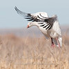 "Snow Goose landing 1 © 2010 Nova Mackentley Bosque del Apache NWR, NM SGW1  <div class=""ss-paypal-button""><div class=""ss-paypal-add-to-cart-section""><div class=""ss-paypal-product-options""><h4>Mat Sizes</h4><ul><li><a href=""https://www.paypal.com/cgi-bin/webscr?cmd=_cart&business=T77V5VKCW4K2U&lc=US&item_name=Snow%20Goose%20landing%201%20%C2%A9%202010%20Nova%20Mackentley%20Bosque%20del%20Apache%20NWR%2C%20NM%20SGW1&item_number=http%3A%2F%2Fwww.nightflightimages.com%2FGalleries-1%2FTravels%2Fi-4CQNc4m&button_subtype=products&no_note=0&cn=Add%20special%20instructions%20to%20the%20seller%3A&no_shipping=2&currency_code=USD&weight_unit=lbs&add=1&bn=PP-ShopCartBF%3Abtn_cart_SM.gif%3ANonHosted&on0=Mat%20Sizes&option_select0=5%20x%207&option_amount0=10.00&option_select1=8%20x%2010&option_amount1=18.00&option_select2=11%20x%2014&option_amount2=28.00&option_select3=card&option_amount3=4.00&option_index=0&charset=utf-8&submit=&os0=5%20x%207"" target=""paypal""><span>5 x 7 $11.00 USD</span><img src=""https://www.paypalobjects.com/en_US/i/btn/btn_cart_SM.gif""></a></li><li><a href=""https://www.paypal.com/cgi-bin/webscr?cmd=_cart&business=T77V5VKCW4K2U&lc=US&item_name=Snow%20Goose%20landing%201%20%C2%A9%202010%20Nova%20Mackentley%20Bosque%20del%20Apache%20NWR%2C%20NM%20SGW1&item_number=http%3A%2F%2Fwww.nightflightimages.com%2FGalleries-1%2FTravels%2Fi-4CQNc4m&button_subtype=products&no_note=0&cn=Add%20special%20instructions%20to%20the%20seller%3A&no_shipping=2&currency_code=USD&weight_unit=lbs&add=1&bn=PP-ShopCartBF%3Abtn_cart_SM.gif%3ANonHosted&on0=Mat%20Sizes&option_select0=5%20x%207&option_amount0=10.00&option_select1=8%20x%2010&option_amount1=18.00&option_select2=11%20x%2014&option_amount2=28.00&option_select3=card&option_amount3=4.00&option_index=0&charset=utf-8&submit=&os0=8%20x%2010"" target=""paypal""><span>8 x 10 $19.00 USD</span><img src=""https://www.paypalobjects.com/en_US/i/btn/btn_cart_SM.gif""></a></li><li><a href=""https://www.paypal.com/cgi-bin/webscr?cmd=_cart&business=T77V5VKCW4K2U&lc=US&item_name=Snow%20Goose%20landing%201%20%C2%A9%202010%20Nova%20Mackentley%20Bosque%20del%20Apache%20NWR%2C%20NM%20SGW1&item_number=http%3A%2F%2Fwww.nightflightimages.com%2FGalleries-1%2FTravels%2Fi-4CQNc4m&button_subtype=products&no_note=0&cn=Add%20special%20instructions%20to%20the%20seller%3A&no_shipping=2&currency_code=USD&weight_unit=lbs&add=1&bn=PP-ShopCartBF%3Abtn_cart_SM.gif%3ANonHosted&on0=Mat%20Sizes&option_select0=5%20x%207&option_amount0=10.00&option_select1=8%20x%2010&option_amount1=18.00&option_select2=11%20x%2014&option_amount2=28.00&option_select3=card&option_amount3=4.00&option_index=0&charset=utf-8&submit=&os0=11%20x%2014"" target=""paypal""><span>11 x 14 $29.00 USD</span><img src=""https://www.paypalobjects.com/en_US/i/btn/btn_cart_SM.gif""></a></li><li><a href=""https://www.paypal.com/cgi-bin/webscr?cmd=_cart&business=T77V5VKCW4K2U&lc=US&item_name=Snow%20Goose%20landing%201%20%C2%A9%202010%20Nova%20Mackentley%20Bosque%20del%20Apache%20NWR%2C%20NM%20SGW1&item_number=http%3A%2F%2Fwww.nightflightimages.com%2FGalleries-1%2FTravels%2Fi-4CQNc4m&button_subtype=products&no_note=0&cn=Add%20special%20instructions%20to%20the%20seller%3A&no_shipping=2&currency_code=USD&weight_unit=lbs&add=1&bn=PP-ShopCartBF%3Abtn_cart_SM.gif%3ANonHosted&on0=Mat%20Sizes&option_select0=5%20x%207&option_amount0=10.00&option_select1=8%20x%2010&option_amount1=18.00&option_select2=11%20x%2014&option_amount2=28.00&option_select3=card&option_amount3=4.00&option_index=0&charset=utf-8&submit=&os0=card"" target=""paypal""><span>card $5.00 USD</span><img src=""https://www.paypalobjects.com/en_US/i/btn/btn_cart_SM.gif""></a></li></ul></div></div> <div class=""ss-paypal-view-cart-section""><a href=""https://www.paypal.com/cgi-bin/webscr?cmd=_cart&business=T77V5VKCW4K2U&display=1&item_name=Snow%20Goose%20landing%201%20%C2%A9%202010%20Nova%20Mackentley%20Bosque%20del%20Apache%20NWR%2C%20NM%20SGW1&item_number=http%3A%2F%2Fwww.nightflightimages.com%2FGalleries-1%2FTravels%2Fi-4CQNc4m&charset=utf-8&submit="" target=""paypal"" class=""ss-paypal-submit-button""><img src=""https://www.paypalobjects.com/en_US/i/btn/btn_viewcart_LG.gif""></a></div></div><div class=""ss-paypal-button-end""></div>"