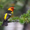 "Western Tanager © 2016 Nova Mackentley Rocky Mtn NP, CO WET  <div class=""ss-paypal-button""><div class=""ss-paypal-add-to-cart-section""><div class=""ss-paypal-product-options""><h4>Mat Sizes</h4><ul><li><a href=""https://www.paypal.com/cgi-bin/webscr?cmd=_cart&amp;business=T77V5VKCW4K2U&amp;lc=US&amp;item_name=Western%20Tanager%20%C2%A9%202016%20Nova%20Mackentley%20Rocky%20Mtn%20NP%2C%20CO%20WET&amp;item_number=http%3A%2F%2Fwww.nightflightimages.com%2FGalleries-1%2FTravels%2Fi-6nbTXVk&amp;button_subtype=products&amp;no_note=0&amp;cn=Add%20special%20instructions%20to%20the%20seller%3A&amp;no_shipping=2&amp;currency_code=USD&amp;weight_unit=lbs&amp;add=1&amp;bn=PP-ShopCartBF%3Abtn_cart_SM.gif%3ANonHosted&amp;on0=Mat%20Sizes&amp;option_select0=5%20x%207&amp;option_amount0=10.00&amp;option_select1=8%20x%2010&amp;option_amount1=18.00&amp;option_select2=11%20x%2014&amp;option_amount2=28.00&amp;option_select3=card&amp;option_amount3=4.00&amp;option_index=0&amp;charset=utf-8&amp;submit=&amp;os0=5%20x%207"" target=""paypal""><span>5 x 7 $11.00 USD</span><img src=""https://www.paypalobjects.com/en_US/i/btn/btn_cart_SM.gif""></a></li><li><a href=""https://www.paypal.com/cgi-bin/webscr?cmd=_cart&amp;business=T77V5VKCW4K2U&amp;lc=US&amp;item_name=Western%20Tanager%20%C2%A9%202016%20Nova%20Mackentley%20Rocky%20Mtn%20NP%2C%20CO%20WET&amp;item_number=http%3A%2F%2Fwww.nightflightimages.com%2FGalleries-1%2FTravels%2Fi-6nbTXVk&amp;button_subtype=products&amp;no_note=0&amp;cn=Add%20special%20instructions%20to%20the%20seller%3A&amp;no_shipping=2&amp;currency_code=USD&amp;weight_unit=lbs&amp;add=1&amp;bn=PP-ShopCartBF%3Abtn_cart_SM.gif%3ANonHosted&amp;on0=Mat%20Sizes&amp;option_select0=5%20x%207&amp;option_amount0=10.00&amp;option_select1=8%20x%2010&amp;option_amount1=18.00&amp;option_select2=11%20x%2014&amp;option_amount2=28.00&amp;option_select3=card&amp;option_amount3=4.00&amp;option_index=0&amp;charset=utf-8&amp;submit=&amp;os0=8%20x%2010"" target=""paypal""><span>8 x 10 $19.00 USD</span><img src=""https://www.paypalobjects.com/en_US/i/btn/btn_cart_SM.gif""></a></li><li><a href=""https://www.paypal.com/cgi-bin/webscr?cmd=_cart&amp;business=T77V5VKCW4K2U&amp;lc=US&amp;item_name=Western%20Tanager%20%C2%A9%202016%20Nova%20Mackentley%20Rocky%20Mtn%20NP%2C%20CO%20WET&amp;item_number=http%3A%2F%2Fwww.nightflightimages.com%2FGalleries-1%2FTravels%2Fi-6nbTXVk&amp;button_subtype=products&amp;no_note=0&amp;cn=Add%20special%20instructions%20to%20the%20seller%3A&amp;no_shipping=2&amp;currency_code=USD&amp;weight_unit=lbs&amp;add=1&amp;bn=PP-ShopCartBF%3Abtn_cart_SM.gif%3ANonHosted&amp;on0=Mat%20Sizes&amp;option_select0=5%20x%207&amp;option_amount0=10.00&amp;option_select1=8%20x%2010&amp;option_amount1=18.00&amp;option_select2=11%20x%2014&amp;option_amount2=28.00&amp;option_select3=card&amp;option_amount3=4.00&amp;option_index=0&amp;charset=utf-8&amp;submit=&amp;os0=11%20x%2014"" target=""paypal""><span>11 x 14 $29.00 USD</span><img src=""https://www.paypalobjects.com/en_US/i/btn/btn_cart_SM.gif""></a></li><li><a href=""https://www.paypal.com/cgi-bin/webscr?cmd=_cart&amp;business=T77V5VKCW4K2U&amp;lc=US&amp;item_name=Western%20Tanager%20%C2%A9%202016%20Nova%20Mackentley%20Rocky%20Mtn%20NP%2C%20CO%20WET&amp;item_number=http%3A%2F%2Fwww.nightflightimages.com%2FGalleries-1%2FTravels%2Fi-6nbTXVk&amp;button_subtype=products&amp;no_note=0&amp;cn=Add%20special%20instructions%20to%20the%20seller%3A&amp;no_shipping=2&amp;currency_code=USD&amp;weight_unit=lbs&amp;add=1&amp;bn=PP-ShopCartBF%3Abtn_cart_SM.gif%3ANonHosted&amp;on0=Mat%20Sizes&amp;option_select0=5%20x%207&amp;option_amount0=10.00&amp;option_select1=8%20x%2010&amp;option_amount1=18.00&amp;option_select2=11%20x%2014&amp;option_amount2=28.00&amp;option_select3=card&amp;option_amount3=4.00&amp;option_index=0&amp;charset=utf-8&amp;submit=&amp;os0=card"" target=""paypal""><span>card $5.00 USD</span><img src=""https://www.paypalobjects.com/en_US/i/btn/btn_cart_SM.gif""></a></li></ul></div></div> <div class=""ss-paypal-view-cart-section""><a href=""https://www.paypal.com/cgi-bin/webscr?cmd=_cart&amp;business=T77V5VKCW4K2U&amp;display=1&amp;item_name=Western%20Tanager%20%C2%A9%202016%20Nova%20Mackentley%20Rocky%20Mtn%20NP%2C%20CO%20WET&amp;item_number=http%3A%2F%2Fwww.nightflightimages.com%2FGalleries-1%2FTravels%2Fi-6nbTXVk&amp;charset=utf-8&amp;submit="" target=""paypal"" class=""ss-paypal-submit-button""><img src=""https://www.paypalobjects.com/en_US/i/btn/btn_viewcart_LG.gif""></a></div></div><div class=""ss-paypal-button-end""></div>"