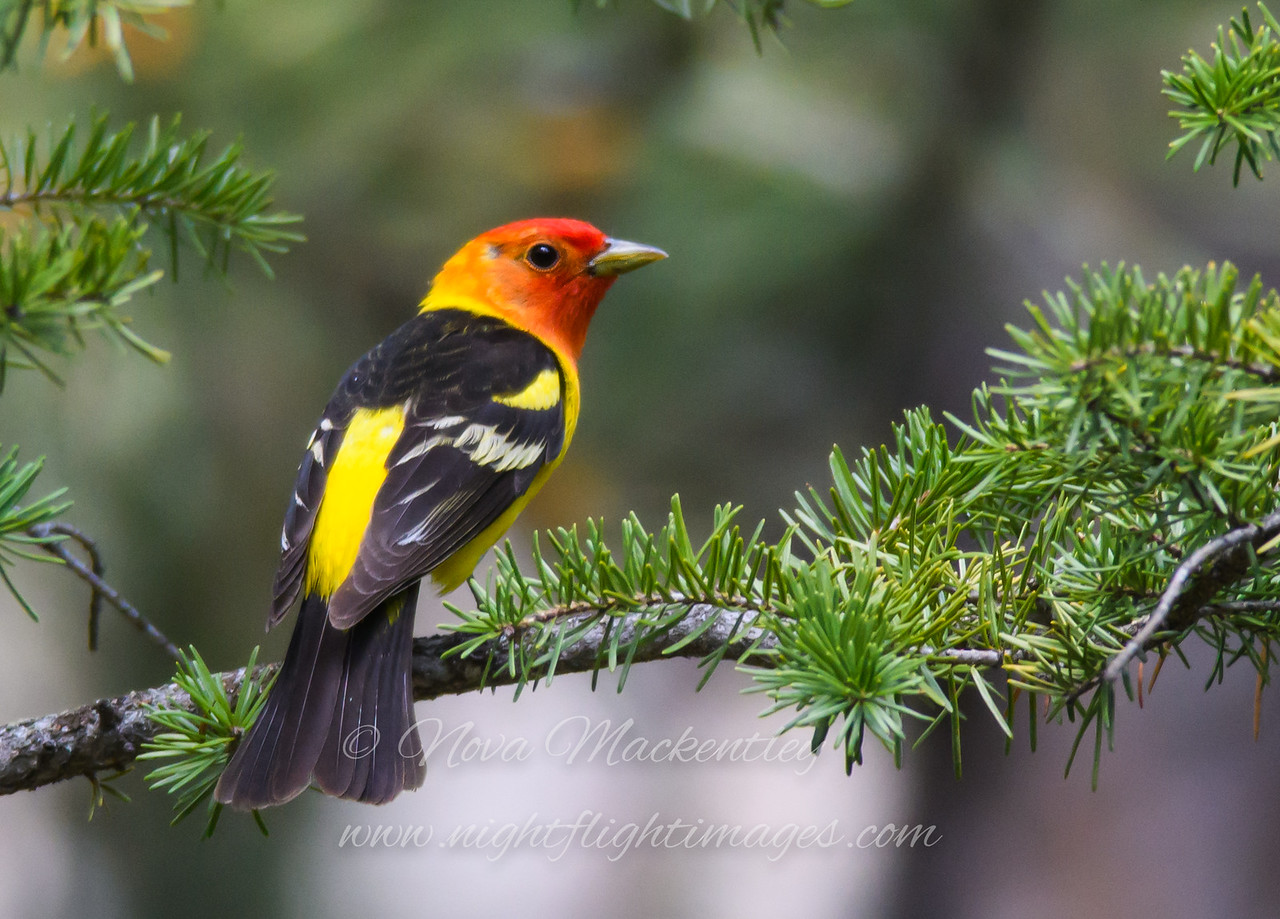 "Western Tanager © 2016 Nova Mackentley Rocky Mtn NP, CO WET  <div class=""ss-paypal-button""><div class=""ss-paypal-add-to-cart-section""><div class=""ss-paypal-product-options""><h4>Mat Sizes</h4><ul><li><a href=""https://www.paypal.com/cgi-bin/webscr?cmd=_cart&business=T77V5VKCW4K2U&lc=US&item_name=Western%20Tanager%20%C2%A9%202016%20Nova%20Mackentley%20Rocky%20Mtn%20NP%2C%20CO%20WET&item_number=http%3A%2F%2Fwww.nightflightimages.com%2FGalleries-1%2FTravels%2Fi-6nbTXVk&button_subtype=products&no_note=0&cn=Add%20special%20instructions%20to%20the%20seller%3A&no_shipping=2&currency_code=USD&weight_unit=lbs&add=1&bn=PP-ShopCartBF%3Abtn_cart_SM.gif%3ANonHosted&on0=Mat%20Sizes&option_select0=5%20x%207&option_amount0=10.00&option_select1=8%20x%2010&option_amount1=18.00&option_select2=11%20x%2014&option_amount2=28.00&option_select3=card&option_amount3=4.00&option_index=0&charset=utf-8&submit=&os0=5%20x%207"" target=""paypal""><span>5 x 7 $11.00 USD</span><img src=""https://www.paypalobjects.com/en_US/i/btn/btn_cart_SM.gif""></a></li><li><a href=""https://www.paypal.com/cgi-bin/webscr?cmd=_cart&business=T77V5VKCW4K2U&lc=US&item_name=Western%20Tanager%20%C2%A9%202016%20Nova%20Mackentley%20Rocky%20Mtn%20NP%2C%20CO%20WET&item_number=http%3A%2F%2Fwww.nightflightimages.com%2FGalleries-1%2FTravels%2Fi-6nbTXVk&button_subtype=products&no_note=0&cn=Add%20special%20instructions%20to%20the%20seller%3A&no_shipping=2&currency_code=USD&weight_unit=lbs&add=1&bn=PP-ShopCartBF%3Abtn_cart_SM.gif%3ANonHosted&on0=Mat%20Sizes&option_select0=5%20x%207&option_amount0=10.00&option_select1=8%20x%2010&option_amount1=18.00&option_select2=11%20x%2014&option_amount2=28.00&option_select3=card&option_amount3=4.00&option_index=0&charset=utf-8&submit=&os0=8%20x%2010"" target=""paypal""><span>8 x 10 $19.00 USD</span><img src=""https://www.paypalobjects.com/en_US/i/btn/btn_cart_SM.gif""></a></li><li><a href=""https://www.paypal.com/cgi-bin/webscr?cmd=_cart&business=T77V5VKCW4K2U&lc=US&item_name=Western%20Tanager%20%C2%A9%202016%20Nova%20Mackentley%20Rocky%20Mtn%20NP%2C%20CO%20WET&item_number=http%3A%2F%2Fwww.nightflightimages.com%2FGalleries-1%2FTravels%2Fi-6nbTXVk&button_subtype=products&no_note=0&cn=Add%20special%20instructions%20to%20the%20seller%3A&no_shipping=2&currency_code=USD&weight_unit=lbs&add=1&bn=PP-ShopCartBF%3Abtn_cart_SM.gif%3ANonHosted&on0=Mat%20Sizes&option_select0=5%20x%207&option_amount0=10.00&option_select1=8%20x%2010&option_amount1=18.00&option_select2=11%20x%2014&option_amount2=28.00&option_select3=card&option_amount3=4.00&option_index=0&charset=utf-8&submit=&os0=11%20x%2014"" target=""paypal""><span>11 x 14 $29.00 USD</span><img src=""https://www.paypalobjects.com/en_US/i/btn/btn_cart_SM.gif""></a></li><li><a href=""https://www.paypal.com/cgi-bin/webscr?cmd=_cart&business=T77V5VKCW4K2U&lc=US&item_name=Western%20Tanager%20%C2%A9%202016%20Nova%20Mackentley%20Rocky%20Mtn%20NP%2C%20CO%20WET&item_number=http%3A%2F%2Fwww.nightflightimages.com%2FGalleries-1%2FTravels%2Fi-6nbTXVk&button_subtype=products&no_note=0&cn=Add%20special%20instructions%20to%20the%20seller%3A&no_shipping=2&currency_code=USD&weight_unit=lbs&add=1&bn=PP-ShopCartBF%3Abtn_cart_SM.gif%3ANonHosted&on0=Mat%20Sizes&option_select0=5%20x%207&option_amount0=10.00&option_select1=8%20x%2010&option_amount1=18.00&option_select2=11%20x%2014&option_amount2=28.00&option_select3=card&option_amount3=4.00&option_index=0&charset=utf-8&submit=&os0=card"" target=""paypal""><span>card $5.00 USD</span><img src=""https://www.paypalobjects.com/en_US/i/btn/btn_cart_SM.gif""></a></li></ul></div></div> <div class=""ss-paypal-view-cart-section""><a href=""https://www.paypal.com/cgi-bin/webscr?cmd=_cart&business=T77V5VKCW4K2U&display=1&item_name=Western%20Tanager%20%C2%A9%202016%20Nova%20Mackentley%20Rocky%20Mtn%20NP%2C%20CO%20WET&item_number=http%3A%2F%2Fwww.nightflightimages.com%2FGalleries-1%2FTravels%2Fi-6nbTXVk&charset=utf-8&submit="" target=""paypal"" class=""ss-paypal-submit-button""><img src=""https://www.paypalobjects.com/en_US/i/btn/btn_viewcart_LG.gif""></a></div></div><div class=""ss-paypal-button-end""></div>"
