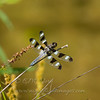 "Twelve-spotted Skimmer  © 2012 C. M. Neri Zeeland, MI 8SPS  <div class=""ss-paypal-button""><div class=""ss-paypal-add-to-cart-section""><div class=""ss-paypal-product-options""><h4>Mat Sizes</h4><ul><li><a href=""https://www.paypal.com/cgi-bin/webscr?cmd=_cart&business=T77V5VKCW4K2U&lc=US&item_name=Twelve-spotted%20Skimmer%20%20%C2%A9%202012%20C.%20M.%20Neri%20Zeeland%2C%20MI%208SPS&item_number=http%3A%2F%2Fwww.nightflightimages.com%2FGalleries-1%2FTravels%2Fi-7CzmXkD&button_subtype=products&no_note=0&cn=Add%20special%20instructions%20to%20the%20seller%3A&no_shipping=2&currency_code=USD&weight_unit=lbs&add=1&bn=PP-ShopCartBF%3Abtn_cart_SM.gif%3ANonHosted&on0=Mat%20Sizes&option_select0=5%20x%207&option_amount0=10.00&option_select1=8%20x%2010&option_amount1=18.00&option_select2=11%20x%2014&option_amount2=28.00&option_select3=card&option_amount3=4.00&option_index=0&charset=utf-8&submit=&os0=5%20x%207"" target=""paypal""><span>5 x 7 $11.00 USD</span><img src=""https://www.paypalobjects.com/en_US/i/btn/btn_cart_SM.gif""></a></li><li><a href=""https://www.paypal.com/cgi-bin/webscr?cmd=_cart&business=T77V5VKCW4K2U&lc=US&item_name=Twelve-spotted%20Skimmer%20%20%C2%A9%202012%20C.%20M.%20Neri%20Zeeland%2C%20MI%208SPS&item_number=http%3A%2F%2Fwww.nightflightimages.com%2FGalleries-1%2FTravels%2Fi-7CzmXkD&button_subtype=products&no_note=0&cn=Add%20special%20instructions%20to%20the%20seller%3A&no_shipping=2&currency_code=USD&weight_unit=lbs&add=1&bn=PP-ShopCartBF%3Abtn_cart_SM.gif%3ANonHosted&on0=Mat%20Sizes&option_select0=5%20x%207&option_amount0=10.00&option_select1=8%20x%2010&option_amount1=18.00&option_select2=11%20x%2014&option_amount2=28.00&option_select3=card&option_amount3=4.00&option_index=0&charset=utf-8&submit=&os0=8%20x%2010"" target=""paypal""><span>8 x 10 $19.00 USD</span><img src=""https://www.paypalobjects.com/en_US/i/btn/btn_cart_SM.gif""></a></li><li><a href=""https://www.paypal.com/cgi-bin/webscr?cmd=_cart&business=T77V5VKCW4K2U&lc=US&item_name=Twelve-spotted%20Skimmer%20%20%C2%A9%202012%20C.%20M.%20Neri%20Zeeland%2C%20MI%208SPS&item_number=http%3A%2F%2Fwww.nightflightimages.com%2FGalleries-1%2FTravels%2Fi-7CzmXkD&button_subtype=products&no_note=0&cn=Add%20special%20instructions%20to%20the%20seller%3A&no_shipping=2&currency_code=USD&weight_unit=lbs&add=1&bn=PP-ShopCartBF%3Abtn_cart_SM.gif%3ANonHosted&on0=Mat%20Sizes&option_select0=5%20x%207&option_amount0=10.00&option_select1=8%20x%2010&option_amount1=18.00&option_select2=11%20x%2014&option_amount2=28.00&option_select3=card&option_amount3=4.00&option_index=0&charset=utf-8&submit=&os0=11%20x%2014"" target=""paypal""><span>11 x 14 $29.00 USD</span><img src=""https://www.paypalobjects.com/en_US/i/btn/btn_cart_SM.gif""></a></li><li><a href=""https://www.paypal.com/cgi-bin/webscr?cmd=_cart&business=T77V5VKCW4K2U&lc=US&item_name=Twelve-spotted%20Skimmer%20%20%C2%A9%202012%20C.%20M.%20Neri%20Zeeland%2C%20MI%208SPS&item_number=http%3A%2F%2Fwww.nightflightimages.com%2FGalleries-1%2FTravels%2Fi-7CzmXkD&button_subtype=products&no_note=0&cn=Add%20special%20instructions%20to%20the%20seller%3A&no_shipping=2&currency_code=USD&weight_unit=lbs&add=1&bn=PP-ShopCartBF%3Abtn_cart_SM.gif%3ANonHosted&on0=Mat%20Sizes&option_select0=5%20x%207&option_amount0=10.00&option_select1=8%20x%2010&option_amount1=18.00&option_select2=11%20x%2014&option_amount2=28.00&option_select3=card&option_amount3=4.00&option_index=0&charset=utf-8&submit=&os0=card"" target=""paypal""><span>card $5.00 USD</span><img src=""https://www.paypalobjects.com/en_US/i/btn/btn_cart_SM.gif""></a></li></ul></div></div> <div class=""ss-paypal-view-cart-section""><a href=""https://www.paypal.com/cgi-bin/webscr?cmd=_cart&business=T77V5VKCW4K2U&display=1&item_name=Twelve-spotted%20Skimmer%20%20%C2%A9%202012%20C.%20M.%20Neri%20Zeeland%2C%20MI%208SPS&item_number=http%3A%2F%2Fwww.nightflightimages.com%2FGalleries-1%2FTravels%2Fi-7CzmXkD&charset=utf-8&submit="" target=""paypal"" class=""ss-paypal-submit-button""><img src=""https://www.paypalobjects.com/en_US/i/btn/btn_viewcart_LG.gif""></a></div></div><div class=""ss-paypal-button-end""></div>"
