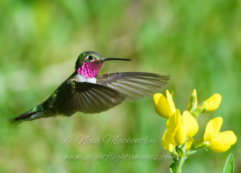 "Broad-tailed Hummingbird © 2016 Nova Mackentley Rocky Mtn NP, CO BTH  <div class=""ss-paypal-button""><div class=""ss-paypal-add-to-cart-section""><div class=""ss-paypal-product-options""><h4>Mat Sizes</h4><ul><li><a href=""https://www.paypal.com/cgi-bin/webscr?cmd=_cart&business=T77V5VKCW4K2U&lc=US&item_name=Broad-tailed%20Hummingbird%20%C2%A9%202016%20Nova%20Mackentley%20Rocky%20Mtn%20NP%2C%20CO%20BTH&item_number=http%3A%2F%2Fwww.nightflightimages.com%2FGalleries-1%2FTravels%2Fi-8DGKXCP&button_subtype=products&no_note=0&cn=Add%20special%20instructions%20to%20the%20seller%3A&no_shipping=2&currency_code=USD&weight_unit=lbs&add=1&bn=PP-ShopCartBF%3Abtn_cart_SM.gif%3ANonHosted&on0=Mat%20Sizes&option_select0=5%20x%207&option_amount0=10.00&option_select1=8%20x%2010&option_amount1=18.00&option_select2=11%20x%2014&option_amount2=28.00&option_select3=card&option_amount3=4.00&option_index=0&charset=utf-8&submit=&os0=5%20x%207"" target=""paypal""><span>5 x 7 $11.00 USD</span><img src=""https://www.paypalobjects.com/en_US/i/btn/btn_cart_SM.gif""></a></li><li><a href=""https://www.paypal.com/cgi-bin/webscr?cmd=_cart&business=T77V5VKCW4K2U&lc=US&item_name=Broad-tailed%20Hummingbird%20%C2%A9%202016%20Nova%20Mackentley%20Rocky%20Mtn%20NP%2C%20CO%20BTH&item_number=http%3A%2F%2Fwww.nightflightimages.com%2FGalleries-1%2FTravels%2Fi-8DGKXCP&button_subtype=products&no_note=0&cn=Add%20special%20instructions%20to%20the%20seller%3A&no_shipping=2&currency_code=USD&weight_unit=lbs&add=1&bn=PP-ShopCartBF%3Abtn_cart_SM.gif%3ANonHosted&on0=Mat%20Sizes&option_select0=5%20x%207&option_amount0=10.00&option_select1=8%20x%2010&option_amount1=18.00&option_select2=11%20x%2014&option_amount2=28.00&option_select3=card&option_amount3=4.00&option_index=0&charset=utf-8&submit=&os0=8%20x%2010"" target=""paypal""><span>8 x 10 $19.00 USD</span><img src=""https://www.paypalobjects.com/en_US/i/btn/btn_cart_SM.gif""></a></li><li><a href=""https://www.paypal.com/cgi-bin/webscr?cmd=_cart&business=T77V5VKCW4K2U&lc=US&item_name=Broad-tailed%20Hummingbird%20%C2%A9%202016%20Nova%20Mackentley%20Rocky%20Mtn%20NP%2C%20CO%20BTH&item_number=http%3A%2F%2Fwww.nightflightimages.com%2FGalleries-1%2FTravels%2Fi-8DGKXCP&button_subtype=products&no_note=0&cn=Add%20special%20instructions%20to%20the%20seller%3A&no_shipping=2&currency_code=USD&weight_unit=lbs&add=1&bn=PP-ShopCartBF%3Abtn_cart_SM.gif%3ANonHosted&on0=Mat%20Sizes&option_select0=5%20x%207&option_amount0=10.00&option_select1=8%20x%2010&option_amount1=18.00&option_select2=11%20x%2014&option_amount2=28.00&option_select3=card&option_amount3=4.00&option_index=0&charset=utf-8&submit=&os0=11%20x%2014"" target=""paypal""><span>11 x 14 $29.00 USD</span><img src=""https://www.paypalobjects.com/en_US/i/btn/btn_cart_SM.gif""></a></li><li><a href=""https://www.paypal.com/cgi-bin/webscr?cmd=_cart&business=T77V5VKCW4K2U&lc=US&item_name=Broad-tailed%20Hummingbird%20%C2%A9%202016%20Nova%20Mackentley%20Rocky%20Mtn%20NP%2C%20CO%20BTH&item_number=http%3A%2F%2Fwww.nightflightimages.com%2FGalleries-1%2FTravels%2Fi-8DGKXCP&button_subtype=products&no_note=0&cn=Add%20special%20instructions%20to%20the%20seller%3A&no_shipping=2&currency_code=USD&weight_unit=lbs&add=1&bn=PP-ShopCartBF%3Abtn_cart_SM.gif%3ANonHosted&on0=Mat%20Sizes&option_select0=5%20x%207&option_amount0=10.00&option_select1=8%20x%2010&option_amount1=18.00&option_select2=11%20x%2014&option_amount2=28.00&option_select3=card&option_amount3=4.00&option_index=0&charset=utf-8&submit=&os0=card"" target=""paypal""><span>card $5.00 USD</span><img src=""https://www.paypalobjects.com/en_US/i/btn/btn_cart_SM.gif""></a></li></ul></div></div> <div class=""ss-paypal-view-cart-section""><a href=""https://www.paypal.com/cgi-bin/webscr?cmd=_cart&business=T77V5VKCW4K2U&display=1&item_name=Broad-tailed%20Hummingbird%20%C2%A9%202016%20Nova%20Mackentley%20Rocky%20Mtn%20NP%2C%20CO%20BTH&item_number=http%3A%2F%2Fwww.nightflightimages.com%2FGalleries-1%2FTravels%2Fi-8DGKXCP&charset=utf-8&submit="" target=""paypal"" class=""ss-paypal-submit-button""><img src=""https://www.paypalobjects.com/en_US/i/btn/btn_viewcart_LG.gif""></a></div></div><div class=""ss-paypal-button-end""></div>"