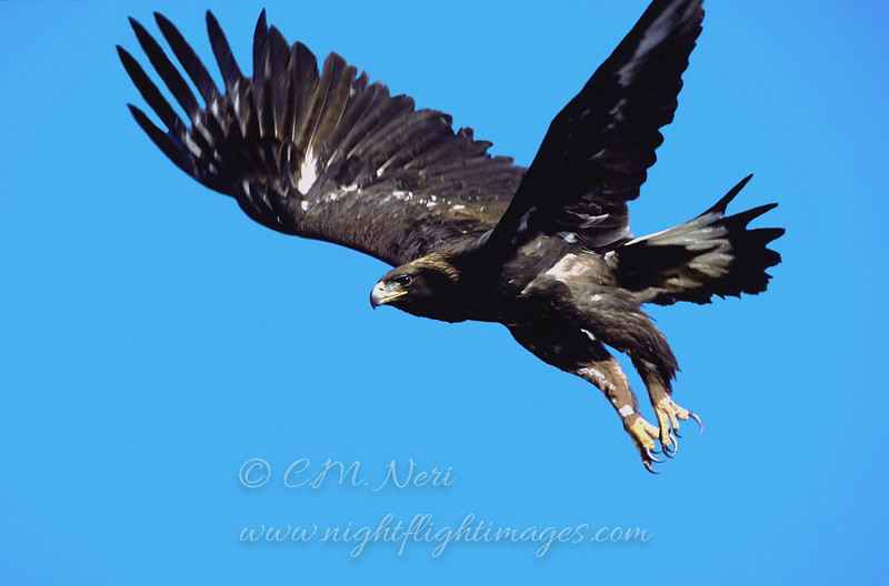 """Golden Eagle  © 2000 C. M. Neri Goshute Mountains, NV GOEANV  <div class=""""ss-paypal-button""""><div class=""""ss-paypal-add-to-cart-section""""><div class=""""ss-paypal-product-options""""><h4>Mat Sizes</h4><ul><li><a href=""""https://www.paypal.com/cgi-bin/webscr?cmd=_cart&amp;business=T77V5VKCW4K2U&amp;lc=US&amp;item_name=Golden%20Eagle%20%20%C2%A9%202000%20C.%20M.%20Neri%20Goshute%20Mountains%2C%20NV%20GOEANV&amp;item_number=http%3A%2F%2Fwww.nightflightimages.com%2FGalleries-1%2FTravels%2Fi-9S5X4mB&amp;button_subtype=products&amp;no_note=0&amp;cn=Add%20special%20instructions%20to%20the%20seller%3A&amp;no_shipping=2&amp;currency_code=USD&amp;weight_unit=lbs&amp;add=1&amp;bn=PP-ShopCartBF%3Abtn_cart_SM.gif%3ANonHosted&amp;on0=Mat%20Sizes&amp;option_select0=5%20x%207&amp;option_amount0=10.00&amp;option_select1=8%20x%2010&amp;option_amount1=18.00&amp;option_select2=11%20x%2014&amp;option_amount2=28.00&amp;option_select3=card&amp;option_amount3=4.00&amp;option_index=0&amp;charset=utf-8&amp;submit=&amp;os0=5%20x%207"""" target=""""paypal""""><span>5 x 7 $11.00 USD</span><img src=""""https://www.paypalobjects.com/en_US/i/btn/btn_cart_SM.gif""""></a></li><li><a href=""""https://www.paypal.com/cgi-bin/webscr?cmd=_cart&amp;business=T77V5VKCW4K2U&amp;lc=US&amp;item_name=Golden%20Eagle%20%20%C2%A9%202000%20C.%20M.%20Neri%20Goshute%20Mountains%2C%20NV%20GOEANV&amp;item_number=http%3A%2F%2Fwww.nightflightimages.com%2FGalleries-1%2FTravels%2Fi-9S5X4mB&amp;button_subtype=products&amp;no_note=0&amp;cn=Add%20special%20instructions%20to%20the%20seller%3A&amp;no_shipping=2&amp;currency_code=USD&amp;weight_unit=lbs&amp;add=1&amp;bn=PP-ShopCartBF%3Abtn_cart_SM.gif%3ANonHosted&amp;on0=Mat%20Sizes&amp;option_select0=5%20x%207&amp;option_amount0=10.00&amp;option_select1=8%20x%2010&amp;option_amount1=18.00&amp;option_select2=11%20x%2014&amp;option_amount2=28.00&amp;option_select3=card&amp;option_amount3=4.00&amp;option_index=0&amp;charset=utf-8&amp;submit=&amp;os0=8%20x%2010"""" target=""""paypal""""><span>8 x 10 $19.00 USD</span><i"""