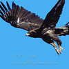 "Golden Eagle  © 2000 C. M. Neri Goshute Mountains, NV GOEANV  <div class=""ss-paypal-button""><div class=""ss-paypal-add-to-cart-section""><div class=""ss-paypal-product-options""><h4>Mat Sizes</h4><ul><li><a href=""https://www.paypal.com/cgi-bin/webscr?cmd=_cart&business=T77V5VKCW4K2U&lc=US&item_name=Golden%20Eagle%20%20%C2%A9%202000%20C.%20M.%20Neri%20Goshute%20Mountains%2C%20NV%20GOEANV&item_number=http%3A%2F%2Fwww.nightflightimages.com%2FGalleries-1%2FTravels%2Fi-9S5X4mB&button_subtype=products&no_note=0&cn=Add%20special%20instructions%20to%20the%20seller%3A&no_shipping=2&currency_code=USD&weight_unit=lbs&add=1&bn=PP-ShopCartBF%3Abtn_cart_SM.gif%3ANonHosted&on0=Mat%20Sizes&option_select0=5%20x%207&option_amount0=10.00&option_select1=8%20x%2010&option_amount1=18.00&option_select2=11%20x%2014&option_amount2=28.00&option_select3=card&option_amount3=4.00&option_index=0&charset=utf-8&submit=&os0=5%20x%207"" target=""paypal""><span>5 x 7 $11.00 USD</span><img src=""https://www.paypalobjects.com/en_US/i/btn/btn_cart_SM.gif""></a></li><li><a href=""https://www.paypal.com/cgi-bin/webscr?cmd=_cart&business=T77V5VKCW4K2U&lc=US&item_name=Golden%20Eagle%20%20%C2%A9%202000%20C.%20M.%20Neri%20Goshute%20Mountains%2C%20NV%20GOEANV&item_number=http%3A%2F%2Fwww.nightflightimages.com%2FGalleries-1%2FTravels%2Fi-9S5X4mB&button_subtype=products&no_note=0&cn=Add%20special%20instructions%20to%20the%20seller%3A&no_shipping=2&currency_code=USD&weight_unit=lbs&add=1&bn=PP-ShopCartBF%3Abtn_cart_SM.gif%3ANonHosted&on0=Mat%20Sizes&option_select0=5%20x%207&option_amount0=10.00&option_select1=8%20x%2010&option_amount1=18.00&option_select2=11%20x%2014&option_amount2=28.00&option_select3=card&option_amount3=4.00&option_index=0&charset=utf-8&submit=&os0=8%20x%2010"" target=""paypal""><span>8 x 10 $19.00 USD</span><img src=""https://www.paypalobjects.com/en_US/i/btn/btn_cart_SM.gif""></a></li><li><a href=""https://www.paypal.com/cgi-bin/webscr?cmd=_cart&business=T77V5VKCW4K2U&lc=US&item_name=Golden%20Eagle%20%20%C2%A9%202000%20C.%20M.%20Neri%20Goshute%20Mountains%2C%20NV%20GOEANV&item_number=http%3A%2F%2Fwww.nightflightimages.com%2FGalleries-1%2FTravels%2Fi-9S5X4mB&button_subtype=products&no_note=0&cn=Add%20special%20instructions%20to%20the%20seller%3A&no_shipping=2&currency_code=USD&weight_unit=lbs&add=1&bn=PP-ShopCartBF%3Abtn_cart_SM.gif%3ANonHosted&on0=Mat%20Sizes&option_select0=5%20x%207&option_amount0=10.00&option_select1=8%20x%2010&option_amount1=18.00&option_select2=11%20x%2014&option_amount2=28.00&option_select3=card&option_amount3=4.00&option_index=0&charset=utf-8&submit=&os0=11%20x%2014"" target=""paypal""><span>11 x 14 $29.00 USD</span><img src=""https://www.paypalobjects.com/en_US/i/btn/btn_cart_SM.gif""></a></li><li><a href=""https://www.paypal.com/cgi-bin/webscr?cmd=_cart&business=T77V5VKCW4K2U&lc=US&item_name=Golden%20Eagle%20%20%C2%A9%202000%20C.%20M.%20Neri%20Goshute%20Mountains%2C%20NV%20GOEANV&item_number=http%3A%2F%2Fwww.nightflightimages.com%2FGalleries-1%2FTravels%2Fi-9S5X4mB&button_subtype=products&no_note=0&cn=Add%20special%20instructions%20to%20the%20seller%3A&no_shipping=2&currency_code=USD&weight_unit=lbs&add=1&bn=PP-ShopCartBF%3Abtn_cart_SM.gif%3ANonHosted&on0=Mat%20Sizes&option_select0=5%20x%207&option_amount0=10.00&option_select1=8%20x%2010&option_amount1=18.00&option_select2=11%20x%2014&option_amount2=28.00&option_select3=card&option_amount3=4.00&option_index=0&charset=utf-8&submit=&os0=card"" target=""paypal""><span>card $5.00 USD</span><img src=""https://www.paypalobjects.com/en_US/i/btn/btn_cart_SM.gif""></a></li></ul></div></div> <div class=""ss-paypal-view-cart-section""><a href=""https://www.paypal.com/cgi-bin/webscr?cmd=_cart&business=T77V5VKCW4K2U&display=1&item_name=Golden%20Eagle%20%20%C2%A9%202000%20C.%20M.%20Neri%20Goshute%20Mountains%2C%20NV%20GOEANV&item_number=http%3A%2F%2Fwww.nightflightimages.com%2FGalleries-1%2FTravels%2Fi-9S5X4mB&charset=utf-8&submit="" target=""paypal"" class=""ss-paypal-submit-button""><img src=""https://www.paypalobjects.com/en_US/i/btn/btn_viewcart_LG.gif""></a></div></div><div class=""ss-paypal-button-end""></div>"