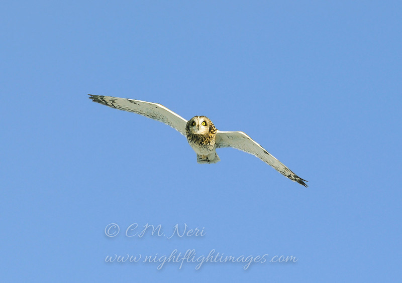 "Short-eared Owl © 2006 Chris Neri  Cape Vincent, NY SEOWNY  <div class=""ss-paypal-button""><div class=""ss-paypal-add-to-cart-section""><div class=""ss-paypal-product-options""><h4>Mat Sizes</h4><ul><li><a href=""https://www.paypal.com/cgi-bin/webscr?cmd=_cart&amp;business=T77V5VKCW4K2U&amp;lc=US&amp;item_name=Short-eared%20Owl%20%C2%A9%202006%20Chris%20Neri%20%20Cape%20Vincent%2C%20NY%20SEOWNY&amp;item_number=http%3A%2F%2Fwww.nightflightimages.com%2FGalleries-1%2FTravels%2Fi-BFV8htp&amp;button_subtype=products&amp;no_note=0&amp;cn=Add%20special%20instructions%20to%20the%20seller%3A&amp;no_shipping=2&amp;currency_code=USD&amp;weight_unit=lbs&amp;add=1&amp;bn=PP-ShopCartBF%3Abtn_cart_SM.gif%3ANonHosted&amp;on0=Mat%20Sizes&amp;option_select0=5%20x%207&amp;option_amount0=10.00&amp;option_select1=8%20x%2010&amp;option_amount1=18.00&amp;option_select2=11%20x%2014&amp;option_amount2=28.00&amp;option_select3=card&amp;option_amount3=4.00&amp;option_index=0&amp;charset=utf-8&amp;submit=&amp;os0=5%20x%207"" target=""paypal""><span>5 x 7 $11.00 USD</span><img src=""https://www.paypalobjects.com/en_US/i/btn/btn_cart_SM.gif""></a></li><li><a href=""https://www.paypal.com/cgi-bin/webscr?cmd=_cart&amp;business=T77V5VKCW4K2U&amp;lc=US&amp;item_name=Short-eared%20Owl%20%C2%A9%202006%20Chris%20Neri%20%20Cape%20Vincent%2C%20NY%20SEOWNY&amp;item_number=http%3A%2F%2Fwww.nightflightimages.com%2FGalleries-1%2FTravels%2Fi-BFV8htp&amp;button_subtype=products&amp;no_note=0&amp;cn=Add%20special%20instructions%20to%20the%20seller%3A&amp;no_shipping=2&amp;currency_code=USD&amp;weight_unit=lbs&amp;add=1&amp;bn=PP-ShopCartBF%3Abtn_cart_SM.gif%3ANonHosted&amp;on0=Mat%20Sizes&amp;option_select0=5%20x%207&amp;option_amount0=10.00&amp;option_select1=8%20x%2010&amp;option_amount1=18.00&amp;option_select2=11%20x%2014&amp;option_amount2=28.00&amp;option_select3=card&amp;option_amount3=4.00&amp;option_index=0&amp;charset=utf-8&amp;submit=&amp;os0=8%20x%2010"" target=""paypal""><span>8 x 10 $19.00 USD</span><img src=""https://www.paypalobjects.com/en_US/i/btn/btn_cart_SM.gif""></a></li><li><a href=""https://www.paypal.com/cgi-bin/webscr?cmd=_cart&amp;business=T77V5VKCW4K2U&amp;lc=US&amp;item_name=Short-eared%20Owl%20%C2%A9%202006%20Chris%20Neri%20%20Cape%20Vincent%2C%20NY%20SEOWNY&amp;item_number=http%3A%2F%2Fwww.nightflightimages.com%2FGalleries-1%2FTravels%2Fi-BFV8htp&amp;button_subtype=products&amp;no_note=0&amp;cn=Add%20special%20instructions%20to%20the%20seller%3A&amp;no_shipping=2&amp;currency_code=USD&amp;weight_unit=lbs&amp;add=1&amp;bn=PP-ShopCartBF%3Abtn_cart_SM.gif%3ANonHosted&amp;on0=Mat%20Sizes&amp;option_select0=5%20x%207&amp;option_amount0=10.00&amp;option_select1=8%20x%2010&amp;option_amount1=18.00&amp;option_select2=11%20x%2014&amp;option_amount2=28.00&amp;option_select3=card&amp;option_amount3=4.00&amp;option_index=0&amp;charset=utf-8&amp;submit=&amp;os0=11%20x%2014"" target=""paypal""><span>11 x 14 $29.00 USD</span><img src=""https://www.paypalobjects.com/en_US/i/btn/btn_cart_SM.gif""></a></li><li><a href=""https://www.paypal.com/cgi-bin/webscr?cmd=_cart&amp;business=T77V5VKCW4K2U&amp;lc=US&amp;item_name=Short-eared%20Owl%20%C2%A9%202006%20Chris%20Neri%20%20Cape%20Vincent%2C%20NY%20SEOWNY&amp;item_number=http%3A%2F%2Fwww.nightflightimages.com%2FGalleries-1%2FTravels%2Fi-BFV8htp&amp;button_subtype=products&amp;no_note=0&amp;cn=Add%20special%20instructions%20to%20the%20seller%3A&amp;no_shipping=2&amp;currency_code=USD&amp;weight_unit=lbs&amp;add=1&amp;bn=PP-ShopCartBF%3Abtn_cart_SM.gif%3ANonHosted&amp;on0=Mat%20Sizes&amp;option_select0=5%20x%207&amp;option_amount0=10.00&amp;option_select1=8%20x%2010&amp;option_amount1=18.00&amp;option_select2=11%20x%2014&amp;option_amount2=28.00&amp;option_select3=card&amp;option_amount3=4.00&amp;option_index=0&amp;charset=utf-8&amp;submit=&amp;os0=card"" target=""paypal""><span>card $5.00 USD</span><img src=""https://www.paypalobjects.com/en_US/i/btn/btn_cart_SM.gif""></a></li></ul></div></div> <div class=""ss-paypal-view-cart-section""><a href=""https://www.paypal.com/cgi-bin/webscr?cmd=_cart&amp;business=T77V5VKCW4K2U&amp;display=1&amp;item_name=Short-eared%20Owl%20%C2%A9%202006%20Chris%20Neri%20%20Cape%20Vincent%2C%20NY%20SEOWNY&amp;item_number=http%3A%2F%2Fwww.nightflightimages.com%2FGalleries-1%2FTravels%2Fi-BFV8htp&amp;charset=utf-8&amp;submit="" target=""paypal"" class=""ss-paypal-submit-button""><img src=""https://www.paypalobjects.com/en_US/i/btn/btn_viewcart_LG.gif""></a></div></div><div class=""ss-paypal-button-end""></div>"