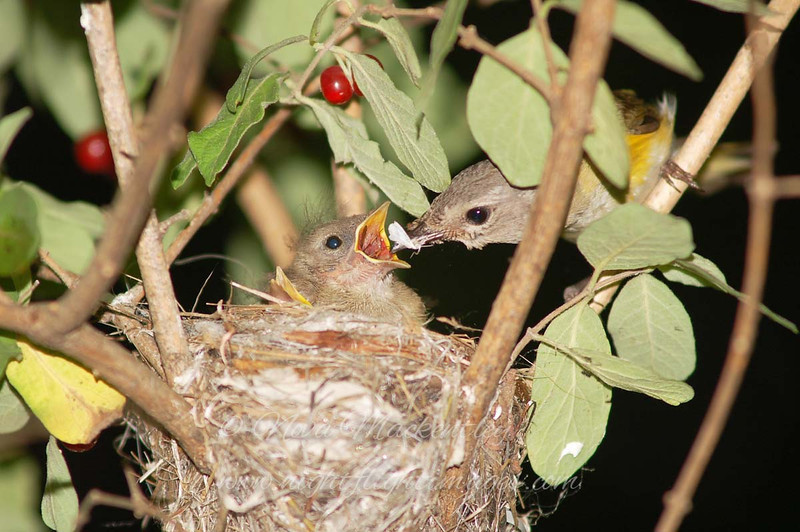"American Redstart nest © 2007 Nova Mackentley Sherman, NY RSF  <div class=""ss-paypal-button""><div class=""ss-paypal-add-to-cart-section""><div class=""ss-paypal-product-options""><h4>Mat Sizes</h4><ul><li><a href=""https://www.paypal.com/cgi-bin/webscr?cmd=_cart&amp;business=T77V5VKCW4K2U&amp;lc=US&amp;item_name=American%20Redstart%20nest%20%C2%A9%202007%20Nova%20Mackentley%20Sherman%2C%20NY%20RSF&amp;item_number=http%3A%2F%2Fwww.nightflightimages.com%2FGalleries-1%2FTravels%2Fi-Cxz4S4m&amp;button_subtype=products&amp;no_note=0&amp;cn=Add%20special%20instructions%20to%20the%20seller%3A&amp;no_shipping=2&amp;currency_code=USD&amp;weight_unit=lbs&amp;add=1&amp;bn=PP-ShopCartBF%3Abtn_cart_SM.gif%3ANonHosted&amp;on0=Mat%20Sizes&amp;option_select0=5%20x%207&amp;option_amount0=10.00&amp;option_select1=8%20x%2010&amp;option_amount1=18.00&amp;option_select2=11%20x%2014&amp;option_amount2=28.00&amp;option_select3=card&amp;option_amount3=4.00&amp;option_index=0&amp;charset=utf-8&amp;submit=&amp;os0=5%20x%207"" target=""paypal""><span>5 x 7 $11.00 USD</span><img src=""https://www.paypalobjects.com/en_US/i/btn/btn_cart_SM.gif""></a></li><li><a href=""https://www.paypal.com/cgi-bin/webscr?cmd=_cart&amp;business=T77V5VKCW4K2U&amp;lc=US&amp;item_name=American%20Redstart%20nest%20%C2%A9%202007%20Nova%20Mackentley%20Sherman%2C%20NY%20RSF&amp;item_number=http%3A%2F%2Fwww.nightflightimages.com%2FGalleries-1%2FTravels%2Fi-Cxz4S4m&amp;button_subtype=products&amp;no_note=0&amp;cn=Add%20special%20instructions%20to%20the%20seller%3A&amp;no_shipping=2&amp;currency_code=USD&amp;weight_unit=lbs&amp;add=1&amp;bn=PP-ShopCartBF%3Abtn_cart_SM.gif%3ANonHosted&amp;on0=Mat%20Sizes&amp;option_select0=5%20x%207&amp;option_amount0=10.00&amp;option_select1=8%20x%2010&amp;option_amount1=18.00&amp;option_select2=11%20x%2014&amp;option_amount2=28.00&amp;option_select3=card&amp;option_amount3=4.00&amp;option_index=0&amp;charset=utf-8&amp;submit=&amp;os0=8%20x%2010"" target=""paypal""><span>8 x 10 $19.00 USD</span><img src=""https://www.paypalobjects.com/en_US/i/btn/btn_cart_SM.gif""></a></li><li><a href=""https://www.paypal.com/cgi-bin/webscr?cmd=_cart&amp;business=T77V5VKCW4K2U&amp;lc=US&amp;item_name=American%20Redstart%20nest%20%C2%A9%202007%20Nova%20Mackentley%20Sherman%2C%20NY%20RSF&amp;item_number=http%3A%2F%2Fwww.nightflightimages.com%2FGalleries-1%2FTravels%2Fi-Cxz4S4m&amp;button_subtype=products&amp;no_note=0&amp;cn=Add%20special%20instructions%20to%20the%20seller%3A&amp;no_shipping=2&amp;currency_code=USD&amp;weight_unit=lbs&amp;add=1&amp;bn=PP-ShopCartBF%3Abtn_cart_SM.gif%3ANonHosted&amp;on0=Mat%20Sizes&amp;option_select0=5%20x%207&amp;option_amount0=10.00&amp;option_select1=8%20x%2010&amp;option_amount1=18.00&amp;option_select2=11%20x%2014&amp;option_amount2=28.00&amp;option_select3=card&amp;option_amount3=4.00&amp;option_index=0&amp;charset=utf-8&amp;submit=&amp;os0=11%20x%2014"" target=""paypal""><span>11 x 14 $29.00 USD</span><img src=""https://www.paypalobjects.com/en_US/i/btn/btn_cart_SM.gif""></a></li><li><a href=""https://www.paypal.com/cgi-bin/webscr?cmd=_cart&amp;business=T77V5VKCW4K2U&amp;lc=US&amp;item_name=American%20Redstart%20nest%20%C2%A9%202007%20Nova%20Mackentley%20Sherman%2C%20NY%20RSF&amp;item_number=http%3A%2F%2Fwww.nightflightimages.com%2FGalleries-1%2FTravels%2Fi-Cxz4S4m&amp;button_subtype=products&amp;no_note=0&amp;cn=Add%20special%20instructions%20to%20the%20seller%3A&amp;no_shipping=2&amp;currency_code=USD&amp;weight_unit=lbs&amp;add=1&amp;bn=PP-ShopCartBF%3Abtn_cart_SM.gif%3ANonHosted&amp;on0=Mat%20Sizes&amp;option_select0=5%20x%207&amp;option_amount0=10.00&amp;option_select1=8%20x%2010&amp;option_amount1=18.00&amp;option_select2=11%20x%2014&amp;option_amount2=28.00&amp;option_select3=card&amp;option_amount3=4.00&amp;option_index=0&amp;charset=utf-8&amp;submit=&amp;os0=card"" target=""paypal""><span>card $5.00 USD</span><img src=""https://www.paypalobjects.com/en_US/i/btn/btn_cart_SM.gif""></a></li></ul></div></div> <div class=""ss-paypal-view-cart-section""><a href=""https://www.paypal.com/cgi-bin/webscr?cmd=_cart&amp;business=T77V5VKCW4K2U&amp;display=1&amp;item_name=American%20Redstart%20nest%20%C2%A9%202007%20Nova%20Mackentley%20Sherman%2C%20NY%20RSF&amp;item_number=http%3A%2F%2Fwww.nightflightimages.com%2FGalleries-1%2FTravels%2Fi-Cxz4S4m&amp;charset=utf-8&amp;submit="" target=""paypal"" class=""ss-paypal-submit-button""><img src=""https://www.paypalobjects.com/en_US/i/btn/btn_viewcart_LG.gif""></a></div></div><div class=""ss-paypal-button-end""></div>"