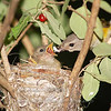 "American Redstart nest © 2007 Nova Mackentley Sherman, NY RSF  <div class=""ss-paypal-button""><div class=""ss-paypal-add-to-cart-section""><div class=""ss-paypal-product-options""><h4>Mat Sizes</h4><ul><li><a href=""https://www.paypal.com/cgi-bin/webscr?cmd=_cart&business=T77V5VKCW4K2U&lc=US&item_name=American%20Redstart%20nest%20%C2%A9%202007%20Nova%20Mackentley%20Sherman%2C%20NY%20RSF&item_number=http%3A%2F%2Fwww.nightflightimages.com%2FGalleries-1%2FTravels%2Fi-Cxz4S4m&button_subtype=products&no_note=0&cn=Add%20special%20instructions%20to%20the%20seller%3A&no_shipping=2&currency_code=USD&weight_unit=lbs&add=1&bn=PP-ShopCartBF%3Abtn_cart_SM.gif%3ANonHosted&on0=Mat%20Sizes&option_select0=5%20x%207&option_amount0=10.00&option_select1=8%20x%2010&option_amount1=18.00&option_select2=11%20x%2014&option_amount2=28.00&option_select3=card&option_amount3=4.00&option_index=0&charset=utf-8&submit=&os0=5%20x%207"" target=""paypal""><span>5 x 7 $11.00 USD</span><img src=""https://www.paypalobjects.com/en_US/i/btn/btn_cart_SM.gif""></a></li><li><a href=""https://www.paypal.com/cgi-bin/webscr?cmd=_cart&business=T77V5VKCW4K2U&lc=US&item_name=American%20Redstart%20nest%20%C2%A9%202007%20Nova%20Mackentley%20Sherman%2C%20NY%20RSF&item_number=http%3A%2F%2Fwww.nightflightimages.com%2FGalleries-1%2FTravels%2Fi-Cxz4S4m&button_subtype=products&no_note=0&cn=Add%20special%20instructions%20to%20the%20seller%3A&no_shipping=2&currency_code=USD&weight_unit=lbs&add=1&bn=PP-ShopCartBF%3Abtn_cart_SM.gif%3ANonHosted&on0=Mat%20Sizes&option_select0=5%20x%207&option_amount0=10.00&option_select1=8%20x%2010&option_amount1=18.00&option_select2=11%20x%2014&option_amount2=28.00&option_select3=card&option_amount3=4.00&option_index=0&charset=utf-8&submit=&os0=8%20x%2010"" target=""paypal""><span>8 x 10 $19.00 USD</span><img src=""https://www.paypalobjects.com/en_US/i/btn/btn_cart_SM.gif""></a></li><li><a href=""https://www.paypal.com/cgi-bin/webscr?cmd=_cart&business=T77V5VKCW4K2U&lc=US&item_name=American%20Redstart%20nest%20%C2%A9%202007%20Nova%20Mackentley%20Sherman%2C%20NY%20RSF&item_number=http%3A%2F%2Fwww.nightflightimages.com%2FGalleries-1%2FTravels%2Fi-Cxz4S4m&button_subtype=products&no_note=0&cn=Add%20special%20instructions%20to%20the%20seller%3A&no_shipping=2&currency_code=USD&weight_unit=lbs&add=1&bn=PP-ShopCartBF%3Abtn_cart_SM.gif%3ANonHosted&on0=Mat%20Sizes&option_select0=5%20x%207&option_amount0=10.00&option_select1=8%20x%2010&option_amount1=18.00&option_select2=11%20x%2014&option_amount2=28.00&option_select3=card&option_amount3=4.00&option_index=0&charset=utf-8&submit=&os0=11%20x%2014"" target=""paypal""><span>11 x 14 $29.00 USD</span><img src=""https://www.paypalobjects.com/en_US/i/btn/btn_cart_SM.gif""></a></li><li><a href=""https://www.paypal.com/cgi-bin/webscr?cmd=_cart&business=T77V5VKCW4K2U&lc=US&item_name=American%20Redstart%20nest%20%C2%A9%202007%20Nova%20Mackentley%20Sherman%2C%20NY%20RSF&item_number=http%3A%2F%2Fwww.nightflightimages.com%2FGalleries-1%2FTravels%2Fi-Cxz4S4m&button_subtype=products&no_note=0&cn=Add%20special%20instructions%20to%20the%20seller%3A&no_shipping=2&currency_code=USD&weight_unit=lbs&add=1&bn=PP-ShopCartBF%3Abtn_cart_SM.gif%3ANonHosted&on0=Mat%20Sizes&option_select0=5%20x%207&option_amount0=10.00&option_select1=8%20x%2010&option_amount1=18.00&option_select2=11%20x%2014&option_amount2=28.00&option_select3=card&option_amount3=4.00&option_index=0&charset=utf-8&submit=&os0=card"" target=""paypal""><span>card $5.00 USD</span><img src=""https://www.paypalobjects.com/en_US/i/btn/btn_cart_SM.gif""></a></li></ul></div></div> <div class=""ss-paypal-view-cart-section""><a href=""https://www.paypal.com/cgi-bin/webscr?cmd=_cart&business=T77V5VKCW4K2U&display=1&item_name=American%20Redstart%20nest%20%C2%A9%202007%20Nova%20Mackentley%20Sherman%2C%20NY%20RSF&item_number=http%3A%2F%2Fwww.nightflightimages.com%2FGalleries-1%2FTravels%2Fi-Cxz4S4m&charset=utf-8&submit="" target=""paypal"" class=""ss-paypal-submit-button""><img src=""https://www.paypalobjects.com/en_US/i/btn/btn_viewcart_LG.gif""></a></div></div><div class=""ss-paypal-button-end""></div>"