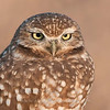 "Burrowing Owl  © 2010 C. M. Neri Salton Sea, CA BUOW  <div class=""ss-paypal-button""><div class=""ss-paypal-add-to-cart-section""><div class=""ss-paypal-product-options""><h4>Mat Sizes</h4><ul><li><a href=""https://www.paypal.com/cgi-bin/webscr?cmd=_cart&amp;business=T77V5VKCW4K2U&amp;lc=US&amp;item_name=Burrowing%20Owl%20%20%C2%A9%202010%20C.%20M.%20Neri%20Salton%20Sea%2C%20CA%20BUOW&amp;item_number=http%3A%2F%2Fwww.nightflightimages.com%2FGalleries-1%2FTravels%2Fi-G76xC69&amp;button_subtype=products&amp;no_note=0&amp;cn=Add%20special%20instructions%20to%20the%20seller%3A&amp;no_shipping=2&amp;currency_code=USD&amp;weight_unit=lbs&amp;add=1&amp;bn=PP-ShopCartBF%3Abtn_cart_SM.gif%3ANonHosted&amp;on0=Mat%20Sizes&amp;option_select0=5%20x%207&amp;option_amount0=10.00&amp;option_select1=8%20x%2010&amp;option_amount1=18.00&amp;option_select2=11%20x%2014&amp;option_amount2=28.00&amp;option_select3=card&amp;option_amount3=4.00&amp;option_index=0&amp;charset=utf-8&amp;submit=&amp;os0=5%20x%207"" target=""paypal""><span>5 x 7 $11.00 USD</span><img src=""https://www.paypalobjects.com/en_US/i/btn/btn_cart_SM.gif""></a></li><li><a href=""https://www.paypal.com/cgi-bin/webscr?cmd=_cart&amp;business=T77V5VKCW4K2U&amp;lc=US&amp;item_name=Burrowing%20Owl%20%20%C2%A9%202010%20C.%20M.%20Neri%20Salton%20Sea%2C%20CA%20BUOW&amp;item_number=http%3A%2F%2Fwww.nightflightimages.com%2FGalleries-1%2FTravels%2Fi-G76xC69&amp;button_subtype=products&amp;no_note=0&amp;cn=Add%20special%20instructions%20to%20the%20seller%3A&amp;no_shipping=2&amp;currency_code=USD&amp;weight_unit=lbs&amp;add=1&amp;bn=PP-ShopCartBF%3Abtn_cart_SM.gif%3ANonHosted&amp;on0=Mat%20Sizes&amp;option_select0=5%20x%207&amp;option_amount0=10.00&amp;option_select1=8%20x%2010&amp;option_amount1=18.00&amp;option_select2=11%20x%2014&amp;option_amount2=28.00&amp;option_select3=card&amp;option_amount3=4.00&amp;option_index=0&amp;charset=utf-8&amp;submit=&amp;os0=8%20x%2010"" target=""paypal""><span>8 x 10 $19.00 USD</span><img src=""https://www.paypalobjects.com/en_US/i/btn/btn_cart_SM.gif""></a></li><li><a href=""https://www.paypal.com/cgi-bin/webscr?cmd=_cart&amp;business=T77V5VKCW4K2U&amp;lc=US&amp;item_name=Burrowing%20Owl%20%20%C2%A9%202010%20C.%20M.%20Neri%20Salton%20Sea%2C%20CA%20BUOW&amp;item_number=http%3A%2F%2Fwww.nightflightimages.com%2FGalleries-1%2FTravels%2Fi-G76xC69&amp;button_subtype=products&amp;no_note=0&amp;cn=Add%20special%20instructions%20to%20the%20seller%3A&amp;no_shipping=2&amp;currency_code=USD&amp;weight_unit=lbs&amp;add=1&amp;bn=PP-ShopCartBF%3Abtn_cart_SM.gif%3ANonHosted&amp;on0=Mat%20Sizes&amp;option_select0=5%20x%207&amp;option_amount0=10.00&amp;option_select1=8%20x%2010&amp;option_amount1=18.00&amp;option_select2=11%20x%2014&amp;option_amount2=28.00&amp;option_select3=card&amp;option_amount3=4.00&amp;option_index=0&amp;charset=utf-8&amp;submit=&amp;os0=11%20x%2014"" target=""paypal""><span>11 x 14 $29.00 USD</span><img src=""https://www.paypalobjects.com/en_US/i/btn/btn_cart_SM.gif""></a></li><li><a href=""https://www.paypal.com/cgi-bin/webscr?cmd=_cart&amp;business=T77V5VKCW4K2U&amp;lc=US&amp;item_name=Burrowing%20Owl%20%20%C2%A9%202010%20C.%20M.%20Neri%20Salton%20Sea%2C%20CA%20BUOW&amp;item_number=http%3A%2F%2Fwww.nightflightimages.com%2FGalleries-1%2FTravels%2Fi-G76xC69&amp;button_subtype=products&amp;no_note=0&amp;cn=Add%20special%20instructions%20to%20the%20seller%3A&amp;no_shipping=2&amp;currency_code=USD&amp;weight_unit=lbs&amp;add=1&amp;bn=PP-ShopCartBF%3Abtn_cart_SM.gif%3ANonHosted&amp;on0=Mat%20Sizes&amp;option_select0=5%20x%207&amp;option_amount0=10.00&amp;option_select1=8%20x%2010&amp;option_amount1=18.00&amp;option_select2=11%20x%2014&amp;option_amount2=28.00&amp;option_select3=card&amp;option_amount3=4.00&amp;option_index=0&amp;charset=utf-8&amp;submit=&amp;os0=card"" target=""paypal""><span>card $5.00 USD</span><img src=""https://www.paypalobjects.com/en_US/i/btn/btn_cart_SM.gif""></a></li></ul></div></div> <div class=""ss-paypal-view-cart-section""><a href=""https://www.paypal.com/cgi-bin/webscr?cmd=_cart&amp;business=T77V5VKCW4K2U&amp;display=1&amp;item_name=Burrowing%20Owl%20%20%C2%A9%202010%20C.%20M.%20Neri%20Salton%20Sea%2C%20CA%20BUOW&amp;item_number=http%3A%2F%2Fwww.nightflightimages.com%2FGalleries-1%2FTravels%2Fi-G76xC69&amp;charset=utf-8&amp;submit="" target=""paypal"" class=""ss-paypal-submit-button""><img src=""https://www.paypalobjects.com/en_US/i/btn/btn_viewcart_LG.gif""></a></div></div><div class=""ss-paypal-button-end""></div>"