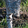 "Bobcat © 2010 Nova Mackentley Northern coast, CA BHO  <div class=""ss-paypal-button""><div class=""ss-paypal-add-to-cart-section""><div class=""ss-paypal-product-options""><h4>Mat Sizes</h4><ul><li><a href=""https://www.paypal.com/cgi-bin/webscr?cmd=_cart&business=T77V5VKCW4K2U&lc=US&item_name=Bobcat%20%C2%A9%202010%20Nova%20Mackentley%20Northern%20coast%2C%20CA%20BHO&item_number=http%3A%2F%2Fwww.nightflightimages.com%2FGalleries-1%2FTravels%2Fi-GL8hHDQ&button_subtype=products&no_note=0&cn=Add%20special%20instructions%20to%20the%20seller%3A&no_shipping=2&currency_code=USD&weight_unit=lbs&add=1&bn=PP-ShopCartBF%3Abtn_cart_SM.gif%3ANonHosted&on0=Mat%20Sizes&option_select0=5%20x%207&option_amount0=10.00&option_select1=8%20x%2010&option_amount1=18.00&option_select2=11%20x%2014&option_amount2=28.00&option_select3=card&option_amount3=4.00&option_index=0&charset=utf-8&submit=&os0=5%20x%207"" target=""paypal""><span>5 x 7 $11.00 USD</span><img src=""https://www.paypalobjects.com/en_US/i/btn/btn_cart_SM.gif""></a></li><li><a href=""https://www.paypal.com/cgi-bin/webscr?cmd=_cart&business=T77V5VKCW4K2U&lc=US&item_name=Bobcat%20%C2%A9%202010%20Nova%20Mackentley%20Northern%20coast%2C%20CA%20BHO&item_number=http%3A%2F%2Fwww.nightflightimages.com%2FGalleries-1%2FTravels%2Fi-GL8hHDQ&button_subtype=products&no_note=0&cn=Add%20special%20instructions%20to%20the%20seller%3A&no_shipping=2&currency_code=USD&weight_unit=lbs&add=1&bn=PP-ShopCartBF%3Abtn_cart_SM.gif%3ANonHosted&on0=Mat%20Sizes&option_select0=5%20x%207&option_amount0=10.00&option_select1=8%20x%2010&option_amount1=18.00&option_select2=11%20x%2014&option_amount2=28.00&option_select3=card&option_amount3=4.00&option_index=0&charset=utf-8&submit=&os0=8%20x%2010"" target=""paypal""><span>8 x 10 $19.00 USD</span><img src=""https://www.paypalobjects.com/en_US/i/btn/btn_cart_SM.gif""></a></li><li><a href=""https://www.paypal.com/cgi-bin/webscr?cmd=_cart&business=T77V5VKCW4K2U&lc=US&item_name=Bobcat%20%C2%A9%202010%20Nova%20Mackentley%20Northern%20coast%2C%20CA%20BHO&item_number=http%3A%2F%2Fwww.nightflightimages.com%2FGalleries-1%2FTravels%2Fi-GL8hHDQ&button_subtype=products&no_note=0&cn=Add%20special%20instructions%20to%20the%20seller%3A&no_shipping=2&currency_code=USD&weight_unit=lbs&add=1&bn=PP-ShopCartBF%3Abtn_cart_SM.gif%3ANonHosted&on0=Mat%20Sizes&option_select0=5%20x%207&option_amount0=10.00&option_select1=8%20x%2010&option_amount1=18.00&option_select2=11%20x%2014&option_amount2=28.00&option_select3=card&option_amount3=4.00&option_index=0&charset=utf-8&submit=&os0=11%20x%2014"" target=""paypal""><span>11 x 14 $29.00 USD</span><img src=""https://www.paypalobjects.com/en_US/i/btn/btn_cart_SM.gif""></a></li><li><a href=""https://www.paypal.com/cgi-bin/webscr?cmd=_cart&business=T77V5VKCW4K2U&lc=US&item_name=Bobcat%20%C2%A9%202010%20Nova%20Mackentley%20Northern%20coast%2C%20CA%20BHO&item_number=http%3A%2F%2Fwww.nightflightimages.com%2FGalleries-1%2FTravels%2Fi-GL8hHDQ&button_subtype=products&no_note=0&cn=Add%20special%20instructions%20to%20the%20seller%3A&no_shipping=2&currency_code=USD&weight_unit=lbs&add=1&bn=PP-ShopCartBF%3Abtn_cart_SM.gif%3ANonHosted&on0=Mat%20Sizes&option_select0=5%20x%207&option_amount0=10.00&option_select1=8%20x%2010&option_amount1=18.00&option_select2=11%20x%2014&option_amount2=28.00&option_select3=card&option_amount3=4.00&option_index=0&charset=utf-8&submit=&os0=card"" target=""paypal""><span>card $5.00 USD</span><img src=""https://www.paypalobjects.com/en_US/i/btn/btn_cart_SM.gif""></a></li></ul></div></div> <div class=""ss-paypal-view-cart-section""><a href=""https://www.paypal.com/cgi-bin/webscr?cmd=_cart&business=T77V5VKCW4K2U&display=1&item_name=Bobcat%20%C2%A9%202010%20Nova%20Mackentley%20Northern%20coast%2C%20CA%20BHO&item_number=http%3A%2F%2Fwww.nightflightimages.com%2FGalleries-1%2FTravels%2Fi-GL8hHDQ&charset=utf-8&submit="" target=""paypal"" class=""ss-paypal-submit-button""><img src=""https://www.paypalobjects.com/en_US/i/btn/btn_viewcart_LG.gif""></a></div></div><div class=""ss-paypal-button-end""></div>"