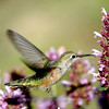 "Broad-tailed Hummingbird  © 2006 C. M. Neri Manzano Mountains, NM BTHU  <div class=""ss-paypal-button""><div class=""ss-paypal-add-to-cart-section""><div class=""ss-paypal-product-options""><h4>Mat Sizes</h4><ul><li><a href=""https://www.paypal.com/cgi-bin/webscr?cmd=_cart&business=T77V5VKCW4K2U&lc=US&item_name=Broad-tailed%20Hummingbird%20%20%C2%A9%202006%20C.%20M.%20Neri%20Manzano%20Mountains%2C%20NM%20BTHU&item_number=http%3A%2F%2Fwww.nightflightimages.com%2FGalleries-1%2FTravels%2Fi-JthzKZX&button_subtype=products&no_note=0&cn=Add%20special%20instructions%20to%20the%20seller%3A&no_shipping=2&currency_code=USD&weight_unit=lbs&add=1&bn=PP-ShopCartBF%3Abtn_cart_SM.gif%3ANonHosted&on0=Mat%20Sizes&option_select0=5%20x%207&option_amount0=10.00&option_select1=8%20x%2010&option_amount1=18.00&option_select2=11%20x%2014&option_amount2=28.00&option_select3=card&option_amount3=4.00&option_index=0&charset=utf-8&submit=&os0=5%20x%207"" target=""paypal""><span>5 x 7 $11.00 USD</span><img src=""https://www.paypalobjects.com/en_US/i/btn/btn_cart_SM.gif""></a></li><li><a href=""https://www.paypal.com/cgi-bin/webscr?cmd=_cart&business=T77V5VKCW4K2U&lc=US&item_name=Broad-tailed%20Hummingbird%20%20%C2%A9%202006%20C.%20M.%20Neri%20Manzano%20Mountains%2C%20NM%20BTHU&item_number=http%3A%2F%2Fwww.nightflightimages.com%2FGalleries-1%2FTravels%2Fi-JthzKZX&button_subtype=products&no_note=0&cn=Add%20special%20instructions%20to%20the%20seller%3A&no_shipping=2&currency_code=USD&weight_unit=lbs&add=1&bn=PP-ShopCartBF%3Abtn_cart_SM.gif%3ANonHosted&on0=Mat%20Sizes&option_select0=5%20x%207&option_amount0=10.00&option_select1=8%20x%2010&option_amount1=18.00&option_select2=11%20x%2014&option_amount2=28.00&option_select3=card&option_amount3=4.00&option_index=0&charset=utf-8&submit=&os0=8%20x%2010"" target=""paypal""><span>8 x 10 $19.00 USD</span><img src=""https://www.paypalobjects.com/en_US/i/btn/btn_cart_SM.gif""></a></li><li><a href=""https://www.paypal.com/cgi-bin/webscr?cmd=_cart&business=T77V5VKCW4K2U&lc=US&item_name=Broad-tailed%20Hummingbird%20%20%C2%A9%202006%20C.%20M.%20Neri%20Manzano%20Mountains%2C%20NM%20BTHU&item_number=http%3A%2F%2Fwww.nightflightimages.com%2FGalleries-1%2FTravels%2Fi-JthzKZX&button_subtype=products&no_note=0&cn=Add%20special%20instructions%20to%20the%20seller%3A&no_shipping=2&currency_code=USD&weight_unit=lbs&add=1&bn=PP-ShopCartBF%3Abtn_cart_SM.gif%3ANonHosted&on0=Mat%20Sizes&option_select0=5%20x%207&option_amount0=10.00&option_select1=8%20x%2010&option_amount1=18.00&option_select2=11%20x%2014&option_amount2=28.00&option_select3=card&option_amount3=4.00&option_index=0&charset=utf-8&submit=&os0=11%20x%2014"" target=""paypal""><span>11 x 14 $29.00 USD</span><img src=""https://www.paypalobjects.com/en_US/i/btn/btn_cart_SM.gif""></a></li><li><a href=""https://www.paypal.com/cgi-bin/webscr?cmd=_cart&business=T77V5VKCW4K2U&lc=US&item_name=Broad-tailed%20Hummingbird%20%20%C2%A9%202006%20C.%20M.%20Neri%20Manzano%20Mountains%2C%20NM%20BTHU&item_number=http%3A%2F%2Fwww.nightflightimages.com%2FGalleries-1%2FTravels%2Fi-JthzKZX&button_subtype=products&no_note=0&cn=Add%20special%20instructions%20to%20the%20seller%3A&no_shipping=2&currency_code=USD&weight_unit=lbs&add=1&bn=PP-ShopCartBF%3Abtn_cart_SM.gif%3ANonHosted&on0=Mat%20Sizes&option_select0=5%20x%207&option_amount0=10.00&option_select1=8%20x%2010&option_amount1=18.00&option_select2=11%20x%2014&option_amount2=28.00&option_select3=card&option_amount3=4.00&option_index=0&charset=utf-8&submit=&os0=card"" target=""paypal""><span>card $5.00 USD</span><img src=""https://www.paypalobjects.com/en_US/i/btn/btn_cart_SM.gif""></a></li></ul></div></div> <div class=""ss-paypal-view-cart-section""><a href=""https://www.paypal.com/cgi-bin/webscr?cmd=_cart&business=T77V5VKCW4K2U&display=1&item_name=Broad-tailed%20Hummingbird%20%20%C2%A9%202006%20C.%20M.%20Neri%20Manzano%20Mountains%2C%20NM%20BTHU&item_number=http%3A%2F%2Fwww.nightflightimages.com%2FGalleries-1%2FTravels%2Fi-JthzKZX&charset=utf-8&submit="" target=""paypal"" class=""ss-paypal-submit-button""><img src=""https://www.paypalobjects.com/en_US/i/btn/btn_viewcart_LG.gif""></a></div></div><div class=""ss-paypal-button-end""></div>"