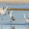 "Sandhill Cranes  © 2011 C. M. Neri Bosque Del Apache NWR, NM SACRFGHT  <div class=""ss-paypal-button""><div class=""ss-paypal-add-to-cart-section""><div class=""ss-paypal-product-options""><h4>Mat Sizes</h4><ul><li><a href=""https://www.paypal.com/cgi-bin/webscr?cmd=_cart&amp;business=T77V5VKCW4K2U&amp;lc=US&amp;item_name=Sandhill%20Cranes%20%20%C2%A9%202011%20C.%20M.%20Neri%20Bosque%20Del%20Apache%20NWR%2C%20NM%20SACRFGHT&amp;item_number=http%3A%2F%2Fwww.nightflightimages.com%2FGalleries-1%2FTravels%2Fi-JvDp7nv&amp;button_subtype=products&amp;no_note=0&amp;cn=Add%20special%20instructions%20to%20the%20seller%3A&amp;no_shipping=2&amp;currency_code=USD&amp;weight_unit=lbs&amp;add=1&amp;bn=PP-ShopCartBF%3Abtn_cart_SM.gif%3ANonHosted&amp;on0=Mat%20Sizes&amp;option_select0=5%20x%207&amp;option_amount0=10.00&amp;option_select1=8%20x%2010&amp;option_amount1=18.00&amp;option_select2=11%20x%2014&amp;option_amount2=28.00&amp;option_select3=card&amp;option_amount3=4.00&amp;option_index=0&amp;charset=utf-8&amp;submit=&amp;os0=5%20x%207"" target=""paypal""><span>5 x 7 $11.00 USD</span><img src=""https://www.paypalobjects.com/en_US/i/btn/btn_cart_SM.gif""></a></li><li><a href=""https://www.paypal.com/cgi-bin/webscr?cmd=_cart&amp;business=T77V5VKCW4K2U&amp;lc=US&amp;item_name=Sandhill%20Cranes%20%20%C2%A9%202011%20C.%20M.%20Neri%20Bosque%20Del%20Apache%20NWR%2C%20NM%20SACRFGHT&amp;item_number=http%3A%2F%2Fwww.nightflightimages.com%2FGalleries-1%2FTravels%2Fi-JvDp7nv&amp;button_subtype=products&amp;no_note=0&amp;cn=Add%20special%20instructions%20to%20the%20seller%3A&amp;no_shipping=2&amp;currency_code=USD&amp;weight_unit=lbs&amp;add=1&amp;bn=PP-ShopCartBF%3Abtn_cart_SM.gif%3ANonHosted&amp;on0=Mat%20Sizes&amp;option_select0=5%20x%207&amp;option_amount0=10.00&amp;option_select1=8%20x%2010&amp;option_amount1=18.00&amp;option_select2=11%20x%2014&amp;option_amount2=28.00&amp;option_select3=card&amp;option_amount3=4.00&amp;option_index=0&amp;charset=utf-8&amp;submit=&amp;os0=8%20x%2010"" target=""paypal""><span>8 x 10 $19.00 USD</span><img src=""https://www.paypalobjects.com/en_US/i/btn/btn_cart_SM.gif""></a></li><li><a href=""https://www.paypal.com/cgi-bin/webscr?cmd=_cart&amp;business=T77V5VKCW4K2U&amp;lc=US&amp;item_name=Sandhill%20Cranes%20%20%C2%A9%202011%20C.%20M.%20Neri%20Bosque%20Del%20Apache%20NWR%2C%20NM%20SACRFGHT&amp;item_number=http%3A%2F%2Fwww.nightflightimages.com%2FGalleries-1%2FTravels%2Fi-JvDp7nv&amp;button_subtype=products&amp;no_note=0&amp;cn=Add%20special%20instructions%20to%20the%20seller%3A&amp;no_shipping=2&amp;currency_code=USD&amp;weight_unit=lbs&amp;add=1&amp;bn=PP-ShopCartBF%3Abtn_cart_SM.gif%3ANonHosted&amp;on0=Mat%20Sizes&amp;option_select0=5%20x%207&amp;option_amount0=10.00&amp;option_select1=8%20x%2010&amp;option_amount1=18.00&amp;option_select2=11%20x%2014&amp;option_amount2=28.00&amp;option_select3=card&amp;option_amount3=4.00&amp;option_index=0&amp;charset=utf-8&amp;submit=&amp;os0=11%20x%2014"" target=""paypal""><span>11 x 14 $29.00 USD</span><img src=""https://www.paypalobjects.com/en_US/i/btn/btn_cart_SM.gif""></a></li><li><a href=""https://www.paypal.com/cgi-bin/webscr?cmd=_cart&amp;business=T77V5VKCW4K2U&amp;lc=US&amp;item_name=Sandhill%20Cranes%20%20%C2%A9%202011%20C.%20M.%20Neri%20Bosque%20Del%20Apache%20NWR%2C%20NM%20SACRFGHT&amp;item_number=http%3A%2F%2Fwww.nightflightimages.com%2FGalleries-1%2FTravels%2Fi-JvDp7nv&amp;button_subtype=products&amp;no_note=0&amp;cn=Add%20special%20instructions%20to%20the%20seller%3A&amp;no_shipping=2&amp;currency_code=USD&amp;weight_unit=lbs&amp;add=1&amp;bn=PP-ShopCartBF%3Abtn_cart_SM.gif%3ANonHosted&amp;on0=Mat%20Sizes&amp;option_select0=5%20x%207&amp;option_amount0=10.00&amp;option_select1=8%20x%2010&amp;option_amount1=18.00&amp;option_select2=11%20x%2014&amp;option_amount2=28.00&amp;option_select3=card&amp;option_amount3=4.00&amp;option_index=0&amp;charset=utf-8&amp;submit=&amp;os0=card"" target=""paypal""><span>card $5.00 USD</span><img src=""https://www.paypalobjects.com/en_US/i/btn/btn_cart_SM.gif""></a></li></ul></div></div> <div class=""ss-paypal-view-cart-section""><a href=""https://www.paypal.com/cgi-bin/webscr?cmd=_cart&amp;business=T77V5VKCW4K2U&amp;display=1&amp;item_name=Sandhill%20Cranes%20%20%C2%A9%202011%20C.%20M.%20Neri%20Bosque%20Del%20Apache%20NWR%2C%20NM%20SACRFGHT&amp;item_number=http%3A%2F%2Fwww.nightflightimages.com%2FGalleries-1%2FTravels%2Fi-JvDp7nv&amp;charset=utf-8&amp;submit="" target=""paypal"" class=""ss-paypal-submit-button""><img src=""https://www.paypalobjects.com/en_US/i/btn/btn_viewcart_LG.gif""></a></div></div><div class=""ss-paypal-button-end""></div>"