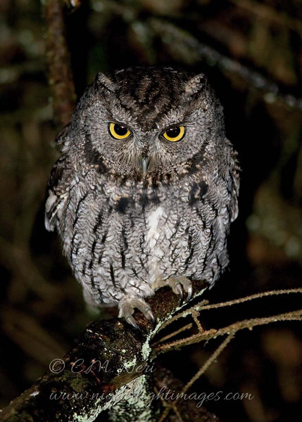 """Western Screech Owl © 2010 C. M. Neri  Big Lagoon, CA WESOCA  <div class=""""ss-paypal-button""""><div class=""""ss-paypal-add-to-cart-section""""><div class=""""ss-paypal-product-options""""><h4>Mat Sizes</h4><ul><li><a href=""""https://www.paypal.com/cgi-bin/webscr?cmd=_cart&amp;business=T77V5VKCW4K2U&amp;lc=US&amp;item_name=Western%20Screech%20Owl%20%C2%A9%202010%20C.%20M.%20Neri%20%20Big%20Lagoon%2C%20CA%20WESOCA&amp;item_number=http%3A%2F%2Fwww.nightflightimages.com%2FGalleries-1%2FTravels%2Fi-KGqwMH8&amp;button_subtype=products&amp;no_note=0&amp;cn=Add%20special%20instructions%20to%20the%20seller%3A&amp;no_shipping=2&amp;currency_code=USD&amp;weight_unit=lbs&amp;add=1&amp;bn=PP-ShopCartBF%3Abtn_cart_SM.gif%3ANonHosted&amp;on0=Mat%20Sizes&amp;option_select0=5%20x%207&amp;option_amount0=10.00&amp;option_select1=8%20x%2010&amp;option_amount1=18.00&amp;option_select2=11%20x%2014&amp;option_amount2=28.00&amp;option_select3=card&amp;option_amount3=4.00&amp;option_index=0&amp;charset=utf-8&amp;submit=&amp;os0=5%20x%207"""" target=""""paypal""""><span>5 x 7 $11.00 USD</span><img src=""""https://www.paypalobjects.com/en_US/i/btn/btn_cart_SM.gif""""></a></li><li><a href=""""https://www.paypal.com/cgi-bin/webscr?cmd=_cart&amp;business=T77V5VKCW4K2U&amp;lc=US&amp;item_name=Western%20Screech%20Owl%20%C2%A9%202010%20C.%20M.%20Neri%20%20Big%20Lagoon%2C%20CA%20WESOCA&amp;item_number=http%3A%2F%2Fwww.nightflightimages.com%2FGalleries-1%2FTravels%2Fi-KGqwMH8&amp;button_subtype=products&amp;no_note=0&amp;cn=Add%20special%20instructions%20to%20the%20seller%3A&amp;no_shipping=2&amp;currency_code=USD&amp;weight_unit=lbs&amp;add=1&amp;bn=PP-ShopCartBF%3Abtn_cart_SM.gif%3ANonHosted&amp;on0=Mat%20Sizes&amp;option_select0=5%20x%207&amp;option_amount0=10.00&amp;option_select1=8%20x%2010&amp;option_amount1=18.00&amp;option_select2=11%20x%2014&amp;option_amount2=28.00&amp;option_select3=card&amp;option_amount3=4.00&amp;option_index=0&amp;charset=utf-8&amp;submit=&amp;os0=8%20x%2010"""" target=""""paypal""""><span>8 x 10 $19.00 USD</spa"""