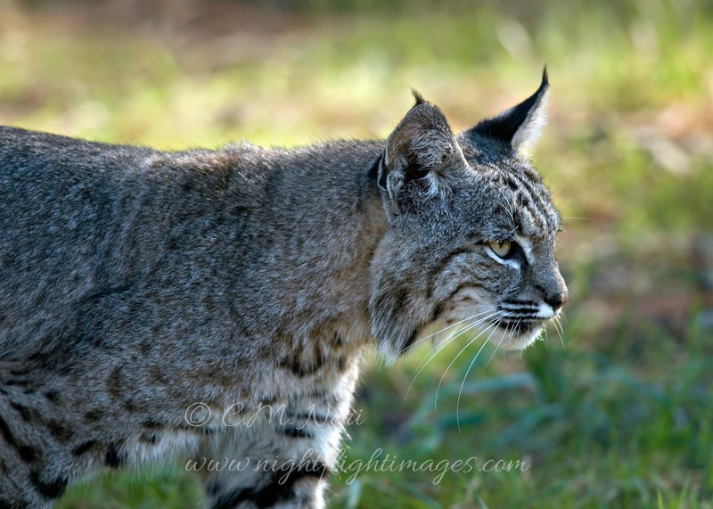 """Bobcat © 2010 C. M. Neri. Montana Del Oro, CA BOBCCA  <div class=""""ss-paypal-button""""><div class=""""ss-paypal-add-to-cart-section""""><div class=""""ss-paypal-product-options""""><h4>Mat Sizes</h4><ul><li><a href=""""https://www.paypal.com/cgi-bin/webscr?cmd=_cart&amp;business=T77V5VKCW4K2U&amp;lc=US&amp;item_name=Bobcat%20%C2%A9%202010%20C.%20M.%20Neri.%20Montana%20Del%20Oro%2C%20CA%20BOBCCA&amp;item_number=http%3A%2F%2Fwww.nightflightimages.com%2FGalleries-1%2FTravels%2Fi-KTkSzbj&amp;button_subtype=products&amp;no_note=0&amp;cn=Add%20special%20instructions%20to%20the%20seller%3A&amp;no_shipping=2&amp;currency_code=USD&amp;weight_unit=lbs&amp;add=1&amp;bn=PP-ShopCartBF%3Abtn_cart_SM.gif%3ANonHosted&amp;on0=Mat%20Sizes&amp;option_select0=5%20x%207&amp;option_amount0=10.00&amp;option_select1=8%20x%2010&amp;option_amount1=18.00&amp;option_select2=11%20x%2014&amp;option_amount2=28.00&amp;option_select3=card&amp;option_amount3=4.00&amp;option_index=0&amp;charset=utf-8&amp;submit=&amp;os0=5%20x%207"""" target=""""paypal""""><span>5 x 7 $11.00 USD</span><img src=""""https://www.paypalobjects.com/en_US/i/btn/btn_cart_SM.gif""""></a></li><li><a href=""""https://www.paypal.com/cgi-bin/webscr?cmd=_cart&amp;business=T77V5VKCW4K2U&amp;lc=US&amp;item_name=Bobcat%20%C2%A9%202010%20C.%20M.%20Neri.%20Montana%20Del%20Oro%2C%20CA%20BOBCCA&amp;item_number=http%3A%2F%2Fwww.nightflightimages.com%2FGalleries-1%2FTravels%2Fi-KTkSzbj&amp;button_subtype=products&amp;no_note=0&amp;cn=Add%20special%20instructions%20to%20the%20seller%3A&amp;no_shipping=2&amp;currency_code=USD&amp;weight_unit=lbs&amp;add=1&amp;bn=PP-ShopCartBF%3Abtn_cart_SM.gif%3ANonHosted&amp;on0=Mat%20Sizes&amp;option_select0=5%20x%207&amp;option_amount0=10.00&amp;option_select1=8%20x%2010&amp;option_amount1=18.00&amp;option_select2=11%20x%2014&amp;option_amount2=28.00&amp;option_select3=card&amp;option_amount3=4.00&amp;option_index=0&amp;charset=utf-8&amp;submit=&amp;os0=8%20x%2010"""" target=""""paypal""""><span>8 x 10 $19.00 USD</span><img src=""""https://www.paypalob"""