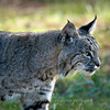 "Bobcat © 2010 C. M. Neri. Montana Del Oro, CA BOBCCA  <div class=""ss-paypal-button""><div class=""ss-paypal-add-to-cart-section""><div class=""ss-paypal-product-options""><h4>Mat Sizes</h4><ul><li><a href=""https://www.paypal.com/cgi-bin/webscr?cmd=_cart&business=T77V5VKCW4K2U&lc=US&item_name=Bobcat%20%C2%A9%202010%20C.%20M.%20Neri.%20Montana%20Del%20Oro%2C%20CA%20BOBCCA&item_number=http%3A%2F%2Fwww.nightflightimages.com%2FGalleries-1%2FTravels%2Fi-KTkSzbj&button_subtype=products&no_note=0&cn=Add%20special%20instructions%20to%20the%20seller%3A&no_shipping=2&currency_code=USD&weight_unit=lbs&add=1&bn=PP-ShopCartBF%3Abtn_cart_SM.gif%3ANonHosted&on0=Mat%20Sizes&option_select0=5%20x%207&option_amount0=10.00&option_select1=8%20x%2010&option_amount1=18.00&option_select2=11%20x%2014&option_amount2=28.00&option_select3=card&option_amount3=4.00&option_index=0&charset=utf-8&submit=&os0=5%20x%207"" target=""paypal""><span>5 x 7 $11.00 USD</span><img src=""https://www.paypalobjects.com/en_US/i/btn/btn_cart_SM.gif""></a></li><li><a href=""https://www.paypal.com/cgi-bin/webscr?cmd=_cart&business=T77V5VKCW4K2U&lc=US&item_name=Bobcat%20%C2%A9%202010%20C.%20M.%20Neri.%20Montana%20Del%20Oro%2C%20CA%20BOBCCA&item_number=http%3A%2F%2Fwww.nightflightimages.com%2FGalleries-1%2FTravels%2Fi-KTkSzbj&button_subtype=products&no_note=0&cn=Add%20special%20instructions%20to%20the%20seller%3A&no_shipping=2&currency_code=USD&weight_unit=lbs&add=1&bn=PP-ShopCartBF%3Abtn_cart_SM.gif%3ANonHosted&on0=Mat%20Sizes&option_select0=5%20x%207&option_amount0=10.00&option_select1=8%20x%2010&option_amount1=18.00&option_select2=11%20x%2014&option_amount2=28.00&option_select3=card&option_amount3=4.00&option_index=0&charset=utf-8&submit=&os0=8%20x%2010"" target=""paypal""><span>8 x 10 $19.00 USD</span><img src=""https://www.paypalobjects.com/en_US/i/btn/btn_cart_SM.gif""></a></li><li><a href=""https://www.paypal.com/cgi-bin/webscr?cmd=_cart&business=T77V5VKCW4K2U&lc=US&item_name=Bobcat%20%C2%A9%202010%20C.%20M.%20Neri.%20Montana%20Del%20Oro%2C%20CA%20BOBCCA&item_number=http%3A%2F%2Fwww.nightflightimages.com%2FGalleries-1%2FTravels%2Fi-KTkSzbj&button_subtype=products&no_note=0&cn=Add%20special%20instructions%20to%20the%20seller%3A&no_shipping=2&currency_code=USD&weight_unit=lbs&add=1&bn=PP-ShopCartBF%3Abtn_cart_SM.gif%3ANonHosted&on0=Mat%20Sizes&option_select0=5%20x%207&option_amount0=10.00&option_select1=8%20x%2010&option_amount1=18.00&option_select2=11%20x%2014&option_amount2=28.00&option_select3=card&option_amount3=4.00&option_index=0&charset=utf-8&submit=&os0=11%20x%2014"" target=""paypal""><span>11 x 14 $29.00 USD</span><img src=""https://www.paypalobjects.com/en_US/i/btn/btn_cart_SM.gif""></a></li><li><a href=""https://www.paypal.com/cgi-bin/webscr?cmd=_cart&business=T77V5VKCW4K2U&lc=US&item_name=Bobcat%20%C2%A9%202010%20C.%20M.%20Neri.%20Montana%20Del%20Oro%2C%20CA%20BOBCCA&item_number=http%3A%2F%2Fwww.nightflightimages.com%2FGalleries-1%2FTravels%2Fi-KTkSzbj&button_subtype=products&no_note=0&cn=Add%20special%20instructions%20to%20the%20seller%3A&no_shipping=2&currency_code=USD&weight_unit=lbs&add=1&bn=PP-ShopCartBF%3Abtn_cart_SM.gif%3ANonHosted&on0=Mat%20Sizes&option_select0=5%20x%207&option_amount0=10.00&option_select1=8%20x%2010&option_amount1=18.00&option_select2=11%20x%2014&option_amount2=28.00&option_select3=card&option_amount3=4.00&option_index=0&charset=utf-8&submit=&os0=card"" target=""paypal""><span>card $5.00 USD</span><img src=""https://www.paypalobjects.com/en_US/i/btn/btn_cart_SM.gif""></a></li></ul></div></div> <div class=""ss-paypal-view-cart-section""><a href=""https://www.paypal.com/cgi-bin/webscr?cmd=_cart&business=T77V5VKCW4K2U&display=1&item_name=Bobcat%20%C2%A9%202010%20C.%20M.%20Neri.%20Montana%20Del%20Oro%2C%20CA%20BOBCCA&item_number=http%3A%2F%2Fwww.nightflightimages.com%2FGalleries-1%2FTravels%2Fi-KTkSzbj&charset=utf-8&submit="" target=""paypal"" class=""ss-paypal-submit-button""><img src=""https://www.paypalobjects.com/en_US/i/btn/btn_viewcart_LG.gif""></a></div></div><div class=""ss-paypal-button-end""></div>"
