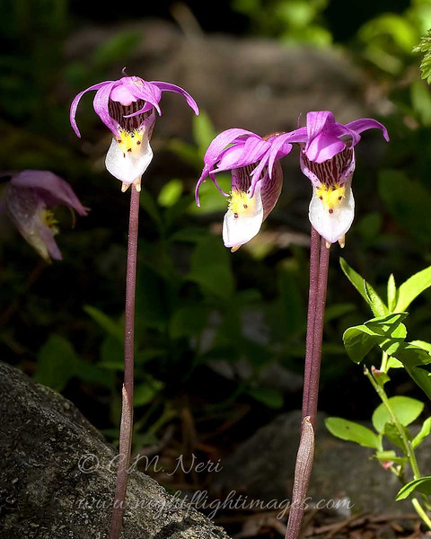 "Fairyslipper Orchids © 2009 C. M. Neri Rocky Mountain National Park, CO FRYSLP  <div class=""ss-paypal-button""><div class=""ss-paypal-add-to-cart-section""><div class=""ss-paypal-product-options""><h4>Mat Sizes</h4><ul><li><a href=""https://www.paypal.com/cgi-bin/webscr?cmd=_cart&business=T77V5VKCW4K2U&lc=US&item_name=Fairyslipper%20Orchids%20%C2%A9%202009%20C.%20M.%20Neri%20Rocky%20Mountain%20National%20Park%2C%20CO%20FRYSLP&item_number=http%3A%2F%2Fwww.nightflightimages.com%2FGalleries-1%2FTravels%2Fi-M3GSVPV&button_subtype=products&no_note=0&cn=Add%20special%20instructions%20to%20the%20seller%3A&no_shipping=2&currency_code=USD&weight_unit=lbs&add=1&bn=PP-ShopCartBF%3Abtn_cart_SM.gif%3ANonHosted&on0=Mat%20Sizes&option_select0=5%20x%207&option_amount0=10.00&option_select1=8%20x%2010&option_amount1=18.00&option_select2=11%20x%2014&option_amount2=28.00&option_select3=card&option_amount3=4.00&option_index=0&charset=utf-8&submit=&os0=5%20x%207"" target=""paypal""><span>5 x 7 $11.00 USD</span><img src=""https://www.paypalobjects.com/en_US/i/btn/btn_cart_SM.gif""></a></li><li><a href=""https://www.paypal.com/cgi-bin/webscr?cmd=_cart&business=T77V5VKCW4K2U&lc=US&item_name=Fairyslipper%20Orchids%20%C2%A9%202009%20C.%20M.%20Neri%20Rocky%20Mountain%20National%20Park%2C%20CO%20FRYSLP&item_number=http%3A%2F%2Fwww.nightflightimages.com%2FGalleries-1%2FTravels%2Fi-M3GSVPV&button_subtype=products&no_note=0&cn=Add%20special%20instructions%20to%20the%20seller%3A&no_shipping=2&currency_code=USD&weight_unit=lbs&add=1&bn=PP-ShopCartBF%3Abtn_cart_SM.gif%3ANonHosted&on0=Mat%20Sizes&option_select0=5%20x%207&option_amount0=10.00&option_select1=8%20x%2010&option_amount1=18.00&option_select2=11%20x%2014&option_amount2=28.00&option_select3=card&option_amount3=4.00&option_index=0&charset=utf-8&submit=&os0=8%20x%2010"" target=""paypal""><span>8 x 10 $19.00 USD</span><img src=""https://www.paypalobjects.com/en_US/i/btn/btn_cart_SM.gif""></a></li><li><a href=""https://www.paypal.com/cgi-bin/webscr?cmd=_cart&business=T77V5VKCW4K2U&lc=US&item_name=Fairyslipper%20Orchids%20%C2%A9%202009%20C.%20M.%20Neri%20Rocky%20Mountain%20National%20Park%2C%20CO%20FRYSLP&item_number=http%3A%2F%2Fwww.nightflightimages.com%2FGalleries-1%2FTravels%2Fi-M3GSVPV&button_subtype=products&no_note=0&cn=Add%20special%20instructions%20to%20the%20seller%3A&no_shipping=2&currency_code=USD&weight_unit=lbs&add=1&bn=PP-ShopCartBF%3Abtn_cart_SM.gif%3ANonHosted&on0=Mat%20Sizes&option_select0=5%20x%207&option_amount0=10.00&option_select1=8%20x%2010&option_amount1=18.00&option_select2=11%20x%2014&option_amount2=28.00&option_select3=card&option_amount3=4.00&option_index=0&charset=utf-8&submit=&os0=11%20x%2014"" target=""paypal""><span>11 x 14 $29.00 USD</span><img src=""https://www.paypalobjects.com/en_US/i/btn/btn_cart_SM.gif""></a></li><li><a href=""https://www.paypal.com/cgi-bin/webscr?cmd=_cart&business=T77V5VKCW4K2U&lc=US&item_name=Fairyslipper%20Orchids%20%C2%A9%202009%20C.%20M.%20Neri%20Rocky%20Mountain%20National%20Park%2C%20CO%20FRYSLP&item_number=http%3A%2F%2Fwww.nightflightimages.com%2FGalleries-1%2FTravels%2Fi-M3GSVPV&button_subtype=products&no_note=0&cn=Add%20special%20instructions%20to%20the%20seller%3A&no_shipping=2&currency_code=USD&weight_unit=lbs&add=1&bn=PP-ShopCartBF%3Abtn_cart_SM.gif%3ANonHosted&on0=Mat%20Sizes&option_select0=5%20x%207&option_amount0=10.00&option_select1=8%20x%2010&option_amount1=18.00&option_select2=11%20x%2014&option_amount2=28.00&option_select3=card&option_amount3=4.00&option_index=0&charset=utf-8&submit=&os0=card"" target=""paypal""><span>card $5.00 USD</span><img src=""https://www.paypalobjects.com/en_US/i/btn/btn_cart_SM.gif""></a></li></ul></div></div> <div class=""ss-paypal-view-cart-section""><a href=""https://www.paypal.com/cgi-bin/webscr?cmd=_cart&business=T77V5VKCW4K2U&display=1&item_name=Fairyslipper%20Orchids%20%C2%A9%202009%20C.%20M.%20Neri%20Rocky%20Mountain%20National%20Park%2C%20CO%20FRYSLP&item_number=http%3A%2F%2Fwww.nightflightimages.com%2FGalleries-1%2FTravels%2Fi-M3GSVPV&charset=utf-8&submit="" target=""paypal"" class=""ss-paypal-submit-button""><img src=""https://www.paypalobjects.com/en_US/i/btn/btn_viewcart_LG.gif""></a></div></div><div class=""ss-paypal-button-end""></div>"
