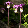 "Fairyslipper Orchids © 2009 C. M. Neri Rocky Mountain National Park, CO FRYSLP  <div class=""ss-paypal-button""><div class=""ss-paypal-add-to-cart-section""><div class=""ss-paypal-product-options""><h4>Mat Sizes</h4><ul><li><a href=""https://www.paypal.com/cgi-bin/webscr?cmd=_cart&amp;business=T77V5VKCW4K2U&amp;lc=US&amp;item_name=Fairyslipper%20Orchids%20%C2%A9%202009%20C.%20M.%20Neri%20Rocky%20Mountain%20National%20Park%2C%20CO%20FRYSLP&amp;item_number=http%3A%2F%2Fwww.nightflightimages.com%2FGalleries-1%2FTravels%2Fi-M3GSVPV&amp;button_subtype=products&amp;no_note=0&amp;cn=Add%20special%20instructions%20to%20the%20seller%3A&amp;no_shipping=2&amp;currency_code=USD&amp;weight_unit=lbs&amp;add=1&amp;bn=PP-ShopCartBF%3Abtn_cart_SM.gif%3ANonHosted&amp;on0=Mat%20Sizes&amp;option_select0=5%20x%207&amp;option_amount0=10.00&amp;option_select1=8%20x%2010&amp;option_amount1=18.00&amp;option_select2=11%20x%2014&amp;option_amount2=28.00&amp;option_select3=card&amp;option_amount3=4.00&amp;option_index=0&amp;charset=utf-8&amp;submit=&amp;os0=5%20x%207"" target=""paypal""><span>5 x 7 $11.00 USD</span><img src=""https://www.paypalobjects.com/en_US/i/btn/btn_cart_SM.gif""></a></li><li><a href=""https://www.paypal.com/cgi-bin/webscr?cmd=_cart&amp;business=T77V5VKCW4K2U&amp;lc=US&amp;item_name=Fairyslipper%20Orchids%20%C2%A9%202009%20C.%20M.%20Neri%20Rocky%20Mountain%20National%20Park%2C%20CO%20FRYSLP&amp;item_number=http%3A%2F%2Fwww.nightflightimages.com%2FGalleries-1%2FTravels%2Fi-M3GSVPV&amp;button_subtype=products&amp;no_note=0&amp;cn=Add%20special%20instructions%20to%20the%20seller%3A&amp;no_shipping=2&amp;currency_code=USD&amp;weight_unit=lbs&amp;add=1&amp;bn=PP-ShopCartBF%3Abtn_cart_SM.gif%3ANonHosted&amp;on0=Mat%20Sizes&amp;option_select0=5%20x%207&amp;option_amount0=10.00&amp;option_select1=8%20x%2010&amp;option_amount1=18.00&amp;option_select2=11%20x%2014&amp;option_amount2=28.00&amp;option_select3=card&amp;option_amount3=4.00&amp;option_index=0&amp;charset=utf-8&amp;submit=&amp;os0=8%20x%2010"" target=""paypal""><span>8 x 10 $19.00 USD</span><img src=""https://www.paypalobjects.com/en_US/i/btn/btn_cart_SM.gif""></a></li><li><a href=""https://www.paypal.com/cgi-bin/webscr?cmd=_cart&amp;business=T77V5VKCW4K2U&amp;lc=US&amp;item_name=Fairyslipper%20Orchids%20%C2%A9%202009%20C.%20M.%20Neri%20Rocky%20Mountain%20National%20Park%2C%20CO%20FRYSLP&amp;item_number=http%3A%2F%2Fwww.nightflightimages.com%2FGalleries-1%2FTravels%2Fi-M3GSVPV&amp;button_subtype=products&amp;no_note=0&amp;cn=Add%20special%20instructions%20to%20the%20seller%3A&amp;no_shipping=2&amp;currency_code=USD&amp;weight_unit=lbs&amp;add=1&amp;bn=PP-ShopCartBF%3Abtn_cart_SM.gif%3ANonHosted&amp;on0=Mat%20Sizes&amp;option_select0=5%20x%207&amp;option_amount0=10.00&amp;option_select1=8%20x%2010&amp;option_amount1=18.00&amp;option_select2=11%20x%2014&amp;option_amount2=28.00&amp;option_select3=card&amp;option_amount3=4.00&amp;option_index=0&amp;charset=utf-8&amp;submit=&amp;os0=11%20x%2014"" target=""paypal""><span>11 x 14 $29.00 USD</span><img src=""https://www.paypalobjects.com/en_US/i/btn/btn_cart_SM.gif""></a></li><li><a href=""https://www.paypal.com/cgi-bin/webscr?cmd=_cart&amp;business=T77V5VKCW4K2U&amp;lc=US&amp;item_name=Fairyslipper%20Orchids%20%C2%A9%202009%20C.%20M.%20Neri%20Rocky%20Mountain%20National%20Park%2C%20CO%20FRYSLP&amp;item_number=http%3A%2F%2Fwww.nightflightimages.com%2FGalleries-1%2FTravels%2Fi-M3GSVPV&amp;button_subtype=products&amp;no_note=0&amp;cn=Add%20special%20instructions%20to%20the%20seller%3A&amp;no_shipping=2&amp;currency_code=USD&amp;weight_unit=lbs&amp;add=1&amp;bn=PP-ShopCartBF%3Abtn_cart_SM.gif%3ANonHosted&amp;on0=Mat%20Sizes&amp;option_select0=5%20x%207&amp;option_amount0=10.00&amp;option_select1=8%20x%2010&amp;option_amount1=18.00&amp;option_select2=11%20x%2014&amp;option_amount2=28.00&amp;option_select3=card&amp;option_amount3=4.00&amp;option_index=0&amp;charset=utf-8&amp;submit=&amp;os0=card"" target=""paypal""><span>card $5.00 USD</span><img src=""https://www.paypalobjects.com/en_US/i/btn/btn_cart_SM.gif""></a></li></ul></div></div> <div class=""ss-paypal-view-cart-section""><a href=""https://www.paypal.com/cgi-bin/webscr?cmd=_cart&amp;business=T77V5VKCW4K2U&amp;display=1&amp;item_name=Fairyslipper%20Orchids%20%C2%A9%202009%20C.%20M.%20Neri%20Rocky%20Mountain%20National%20Park%2C%20CO%20FRYSLP&amp;item_number=http%3A%2F%2Fwww.nightflightimages.com%2FGalleries-1%2FTravels%2Fi-M3GSVPV&amp;charset=utf-8&amp;submit="" target=""paypal"" class=""ss-paypal-submit-button""><img src=""https://www.paypalobjects.com/en_US/i/btn/btn_viewcart_LG.gif""></a></div></div><div class=""ss-paypal-button-end""></div>"
