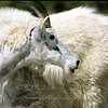 "Mountain Goat © 2002 C. M. Neri.  Glacier National Park, MT MOGO  <div class=""ss-paypal-button""><div class=""ss-paypal-add-to-cart-section""><div class=""ss-paypal-product-options""><h4>Mat Sizes</h4><ul><li><a href=""https://www.paypal.com/cgi-bin/webscr?cmd=_cart&amp;business=T77V5VKCW4K2U&amp;lc=US&amp;item_name=Mountain%20Goat%20%C2%A9%202002%20C.%20M.%20Neri.%20%20Glacier%20National%20Park%2C%20MT%20MOGO&amp;item_number=http%3A%2F%2Fwww.nightflightimages.com%2FGalleries-1%2FTravels%2Fi-MvTB2xh&amp;button_subtype=products&amp;no_note=0&amp;cn=Add%20special%20instructions%20to%20the%20seller%3A&amp;no_shipping=2&amp;currency_code=USD&amp;weight_unit=lbs&amp;add=1&amp;bn=PP-ShopCartBF%3Abtn_cart_SM.gif%3ANonHosted&amp;on0=Mat%20Sizes&amp;option_select0=5%20x%207&amp;option_amount0=10.00&amp;option_select1=8%20x%2010&amp;option_amount1=18.00&amp;option_select2=11%20x%2014&amp;option_amount2=28.00&amp;option_select3=card&amp;option_amount3=4.00&amp;option_index=0&amp;charset=utf-8&amp;submit=&amp;os0=5%20x%207"" target=""paypal""><span>5 x 7 $11.00 USD</span><img src=""https://www.paypalobjects.com/en_US/i/btn/btn_cart_SM.gif""></a></li><li><a href=""https://www.paypal.com/cgi-bin/webscr?cmd=_cart&amp;business=T77V5VKCW4K2U&amp;lc=US&amp;item_name=Mountain%20Goat%20%C2%A9%202002%20C.%20M.%20Neri.%20%20Glacier%20National%20Park%2C%20MT%20MOGO&amp;item_number=http%3A%2F%2Fwww.nightflightimages.com%2FGalleries-1%2FTravels%2Fi-MvTB2xh&amp;button_subtype=products&amp;no_note=0&amp;cn=Add%20special%20instructions%20to%20the%20seller%3A&amp;no_shipping=2&amp;currency_code=USD&amp;weight_unit=lbs&amp;add=1&amp;bn=PP-ShopCartBF%3Abtn_cart_SM.gif%3ANonHosted&amp;on0=Mat%20Sizes&amp;option_select0=5%20x%207&amp;option_amount0=10.00&amp;option_select1=8%20x%2010&amp;option_amount1=18.00&amp;option_select2=11%20x%2014&amp;option_amount2=28.00&amp;option_select3=card&amp;option_amount3=4.00&amp;option_index=0&amp;charset=utf-8&amp;submit=&amp;os0=8%20x%2010"" target=""paypal""><span>8 x 10 $19.00 USD</span><img src=""https://www.paypalobjects.com/en_US/i/btn/btn_cart_SM.gif""></a></li><li><a href=""https://www.paypal.com/cgi-bin/webscr?cmd=_cart&amp;business=T77V5VKCW4K2U&amp;lc=US&amp;item_name=Mountain%20Goat%20%C2%A9%202002%20C.%20M.%20Neri.%20%20Glacier%20National%20Park%2C%20MT%20MOGO&amp;item_number=http%3A%2F%2Fwww.nightflightimages.com%2FGalleries-1%2FTravels%2Fi-MvTB2xh&amp;button_subtype=products&amp;no_note=0&amp;cn=Add%20special%20instructions%20to%20the%20seller%3A&amp;no_shipping=2&amp;currency_code=USD&amp;weight_unit=lbs&amp;add=1&amp;bn=PP-ShopCartBF%3Abtn_cart_SM.gif%3ANonHosted&amp;on0=Mat%20Sizes&amp;option_select0=5%20x%207&amp;option_amount0=10.00&amp;option_select1=8%20x%2010&amp;option_amount1=18.00&amp;option_select2=11%20x%2014&amp;option_amount2=28.00&amp;option_select3=card&amp;option_amount3=4.00&amp;option_index=0&amp;charset=utf-8&amp;submit=&amp;os0=11%20x%2014"" target=""paypal""><span>11 x 14 $29.00 USD</span><img src=""https://www.paypalobjects.com/en_US/i/btn/btn_cart_SM.gif""></a></li><li><a href=""https://www.paypal.com/cgi-bin/webscr?cmd=_cart&amp;business=T77V5VKCW4K2U&amp;lc=US&amp;item_name=Mountain%20Goat%20%C2%A9%202002%20C.%20M.%20Neri.%20%20Glacier%20National%20Park%2C%20MT%20MOGO&amp;item_number=http%3A%2F%2Fwww.nightflightimages.com%2FGalleries-1%2FTravels%2Fi-MvTB2xh&amp;button_subtype=products&amp;no_note=0&amp;cn=Add%20special%20instructions%20to%20the%20seller%3A&amp;no_shipping=2&amp;currency_code=USD&amp;weight_unit=lbs&amp;add=1&amp;bn=PP-ShopCartBF%3Abtn_cart_SM.gif%3ANonHosted&amp;on0=Mat%20Sizes&amp;option_select0=5%20x%207&amp;option_amount0=10.00&amp;option_select1=8%20x%2010&amp;option_amount1=18.00&amp;option_select2=11%20x%2014&amp;option_amount2=28.00&amp;option_select3=card&amp;option_amount3=4.00&amp;option_index=0&amp;charset=utf-8&amp;submit=&amp;os0=card"" target=""paypal""><span>card $5.00 USD</span><img src=""https://www.paypalobjects.com/en_US/i/btn/btn_cart_SM.gif""></a></li></ul></div></div> <div class=""ss-paypal-view-cart-section""><a href=""https://www.paypal.com/cgi-bin/webscr?cmd=_cart&amp;business=T77V5VKCW4K2U&amp;display=1&amp;item_name=Mountain%20Goat%20%C2%A9%202002%20C.%20M.%20Neri.%20%20Glacier%20National%20Park%2C%20MT%20MOGO&amp;item_number=http%3A%2F%2Fwww.nightflightimages.com%2FGalleries-1%2FTravels%2Fi-MvTB2xh&amp;charset=utf-8&amp;submit="" target=""paypal"" class=""ss-paypal-submit-button""><img src=""https://www.paypalobjects.com/en_US/i/btn/btn_viewcart_LG.gif""></a></div></div><div class=""ss-paypal-button-end""></div>"