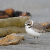 "Snowy Plover © 2010 C. M. Neri.  Moss Landing, CA SNPL  <div class=""ss-paypal-button""><div class=""ss-paypal-add-to-cart-section""><div class=""ss-paypal-product-options""><h4>Mat Sizes</h4><ul><li><a href=""https://www.paypal.com/cgi-bin/webscr?cmd=_cart&amp;business=T77V5VKCW4K2U&amp;lc=US&amp;item_name=Snowy%20Plover%20%C2%A9%202010%20C.%20M.%20Neri.%20%20Moss%20Landing%2C%20CA%20SNPL&amp;item_number=http%3A%2F%2Fwww.nightflightimages.com%2FGalleries-1%2FTravels%2Fi-PDf8M5L&amp;button_subtype=products&amp;no_note=0&amp;cn=Add%20special%20instructions%20to%20the%20seller%3A&amp;no_shipping=2&amp;currency_code=USD&amp;weight_unit=lbs&amp;add=1&amp;bn=PP-ShopCartBF%3Abtn_cart_SM.gif%3ANonHosted&amp;on0=Mat%20Sizes&amp;option_select0=5%20x%207&amp;option_amount0=10.00&amp;option_select1=8%20x%2010&amp;option_amount1=18.00&amp;option_select2=11%20x%2014&amp;option_amount2=28.00&amp;option_select3=card&amp;option_amount3=4.00&amp;option_index=0&amp;charset=utf-8&amp;submit=&amp;os0=5%20x%207"" target=""paypal""><span>5 x 7 $11.00 USD</span><img src=""https://www.paypalobjects.com/en_US/i/btn/btn_cart_SM.gif""></a></li><li><a href=""https://www.paypal.com/cgi-bin/webscr?cmd=_cart&amp;business=T77V5VKCW4K2U&amp;lc=US&amp;item_name=Snowy%20Plover%20%C2%A9%202010%20C.%20M.%20Neri.%20%20Moss%20Landing%2C%20CA%20SNPL&amp;item_number=http%3A%2F%2Fwww.nightflightimages.com%2FGalleries-1%2FTravels%2Fi-PDf8M5L&amp;button_subtype=products&amp;no_note=0&amp;cn=Add%20special%20instructions%20to%20the%20seller%3A&amp;no_shipping=2&amp;currency_code=USD&amp;weight_unit=lbs&amp;add=1&amp;bn=PP-ShopCartBF%3Abtn_cart_SM.gif%3ANonHosted&amp;on0=Mat%20Sizes&amp;option_select0=5%20x%207&amp;option_amount0=10.00&amp;option_select1=8%20x%2010&amp;option_amount1=18.00&amp;option_select2=11%20x%2014&amp;option_amount2=28.00&amp;option_select3=card&amp;option_amount3=4.00&amp;option_index=0&amp;charset=utf-8&amp;submit=&amp;os0=8%20x%2010"" target=""paypal""><span>8 x 10 $19.00 USD</span><img src=""https://www.paypalobjects.com/en_US/i/btn/btn_cart_SM.gif""></a></li><li><a href=""https://www.paypal.com/cgi-bin/webscr?cmd=_cart&amp;business=T77V5VKCW4K2U&amp;lc=US&amp;item_name=Snowy%20Plover%20%C2%A9%202010%20C.%20M.%20Neri.%20%20Moss%20Landing%2C%20CA%20SNPL&amp;item_number=http%3A%2F%2Fwww.nightflightimages.com%2FGalleries-1%2FTravels%2Fi-PDf8M5L&amp;button_subtype=products&amp;no_note=0&amp;cn=Add%20special%20instructions%20to%20the%20seller%3A&amp;no_shipping=2&amp;currency_code=USD&amp;weight_unit=lbs&amp;add=1&amp;bn=PP-ShopCartBF%3Abtn_cart_SM.gif%3ANonHosted&amp;on0=Mat%20Sizes&amp;option_select0=5%20x%207&amp;option_amount0=10.00&amp;option_select1=8%20x%2010&amp;option_amount1=18.00&amp;option_select2=11%20x%2014&amp;option_amount2=28.00&amp;option_select3=card&amp;option_amount3=4.00&amp;option_index=0&amp;charset=utf-8&amp;submit=&amp;os0=11%20x%2014"" target=""paypal""><span>11 x 14 $29.00 USD</span><img src=""https://www.paypalobjects.com/en_US/i/btn/btn_cart_SM.gif""></a></li><li><a href=""https://www.paypal.com/cgi-bin/webscr?cmd=_cart&amp;business=T77V5VKCW4K2U&amp;lc=US&amp;item_name=Snowy%20Plover%20%C2%A9%202010%20C.%20M.%20Neri.%20%20Moss%20Landing%2C%20CA%20SNPL&amp;item_number=http%3A%2F%2Fwww.nightflightimages.com%2FGalleries-1%2FTravels%2Fi-PDf8M5L&amp;button_subtype=products&amp;no_note=0&amp;cn=Add%20special%20instructions%20to%20the%20seller%3A&amp;no_shipping=2&amp;currency_code=USD&amp;weight_unit=lbs&amp;add=1&amp;bn=PP-ShopCartBF%3Abtn_cart_SM.gif%3ANonHosted&amp;on0=Mat%20Sizes&amp;option_select0=5%20x%207&amp;option_amount0=10.00&amp;option_select1=8%20x%2010&amp;option_amount1=18.00&amp;option_select2=11%20x%2014&amp;option_amount2=28.00&amp;option_select3=card&amp;option_amount3=4.00&amp;option_index=0&amp;charset=utf-8&amp;submit=&amp;os0=card"" target=""paypal""><span>card $5.00 USD</span><img src=""https://www.paypalobjects.com/en_US/i/btn/btn_cart_SM.gif""></a></li></ul></div></div> <div class=""ss-paypal-view-cart-section""><a href=""https://www.paypal.com/cgi-bin/webscr?cmd=_cart&amp;business=T77V5VKCW4K2U&amp;display=1&amp;item_name=Snowy%20Plover%20%C2%A9%202010%20C.%20M.%20Neri.%20%20Moss%20Landing%2C%20CA%20SNPL&amp;item_number=http%3A%2F%2Fwww.nightflightimages.com%2FGalleries-1%2FTravels%2Fi-PDf8M5L&amp;charset=utf-8&amp;submit="" target=""paypal"" class=""ss-paypal-submit-button""><img src=""https://www.paypalobjects.com/en_US/i/btn/btn_viewcart_LG.gif""></a></div></div><div class=""ss-paypal-button-end""></div>"