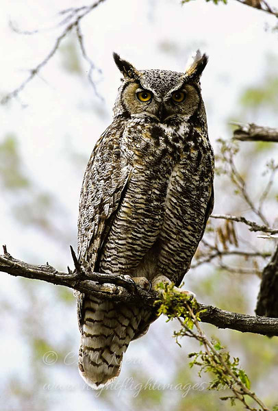"Great Horned Owl © 2002 C. M. Neri  Snake River Canyon,ID GHOWID  <div class=""ss-paypal-button""><div class=""ss-paypal-add-to-cart-section""><div class=""ss-paypal-product-options""><h4>Mat Sizes</h4><ul><li><a href=""https://www.paypal.com/cgi-bin/webscr?cmd=_cart&business=T77V5VKCW4K2U&lc=US&item_name=Great%20Horned%20Owl%20%C2%A9%202002%20C.%20M.%20Neri%20%20Snake%20River%20Canyon%2CID%20GHOWID&item_number=http%3A%2F%2Fwww.nightflightimages.com%2FGalleries-1%2FTravels%2Fi-RwQhzWc&button_subtype=products&no_note=0&cn=Add%20special%20instructions%20to%20the%20seller%3A&no_shipping=2&currency_code=USD&weight_unit=lbs&add=1&bn=PP-ShopCartBF%3Abtn_cart_SM.gif%3ANonHosted&on0=Mat%20Sizes&option_select0=5%20x%207&option_amount0=10.00&option_select1=8%20x%2010&option_amount1=18.00&option_select2=11%20x%2014&option_amount2=28.00&option_select3=card&option_amount3=4.00&option_index=0&charset=utf-8&submit=&os0=5%20x%207"" target=""paypal""><span>5 x 7 $11.00 USD</span><img src=""https://www.paypalobjects.com/en_US/i/btn/btn_cart_SM.gif""></a></li><li><a href=""https://www.paypal.com/cgi-bin/webscr?cmd=_cart&business=T77V5VKCW4K2U&lc=US&item_name=Great%20Horned%20Owl%20%C2%A9%202002%20C.%20M.%20Neri%20%20Snake%20River%20Canyon%2CID%20GHOWID&item_number=http%3A%2F%2Fwww.nightflightimages.com%2FGalleries-1%2FTravels%2Fi-RwQhzWc&button_subtype=products&no_note=0&cn=Add%20special%20instructions%20to%20the%20seller%3A&no_shipping=2&currency_code=USD&weight_unit=lbs&add=1&bn=PP-ShopCartBF%3Abtn_cart_SM.gif%3ANonHosted&on0=Mat%20Sizes&option_select0=5%20x%207&option_amount0=10.00&option_select1=8%20x%2010&option_amount1=18.00&option_select2=11%20x%2014&option_amount2=28.00&option_select3=card&option_amount3=4.00&option_index=0&charset=utf-8&submit=&os0=8%20x%2010"" target=""paypal""><span>8 x 10 $19.00 USD</span><img src=""https://www.paypalobjects.com/en_US/i/btn/btn_cart_SM.gif""></a></li><li><a href=""https://www.paypal.com/cgi-bin/webscr?cmd=_cart&business=T77V5VKCW4K2U&lc=US&item_name=Great%20Horned%20Owl%20%C2%A9%202002%20C.%20M.%20Neri%20%20Snake%20River%20Canyon%2CID%20GHOWID&item_number=http%3A%2F%2Fwww.nightflightimages.com%2FGalleries-1%2FTravels%2Fi-RwQhzWc&button_subtype=products&no_note=0&cn=Add%20special%20instructions%20to%20the%20seller%3A&no_shipping=2&currency_code=USD&weight_unit=lbs&add=1&bn=PP-ShopCartBF%3Abtn_cart_SM.gif%3ANonHosted&on0=Mat%20Sizes&option_select0=5%20x%207&option_amount0=10.00&option_select1=8%20x%2010&option_amount1=18.00&option_select2=11%20x%2014&option_amount2=28.00&option_select3=card&option_amount3=4.00&option_index=0&charset=utf-8&submit=&os0=11%20x%2014"" target=""paypal""><span>11 x 14 $29.00 USD</span><img src=""https://www.paypalobjects.com/en_US/i/btn/btn_cart_SM.gif""></a></li><li><a href=""https://www.paypal.com/cgi-bin/webscr?cmd=_cart&business=T77V5VKCW4K2U&lc=US&item_name=Great%20Horned%20Owl%20%C2%A9%202002%20C.%20M.%20Neri%20%20Snake%20River%20Canyon%2CID%20GHOWID&item_number=http%3A%2F%2Fwww.nightflightimages.com%2FGalleries-1%2FTravels%2Fi-RwQhzWc&button_subtype=products&no_note=0&cn=Add%20special%20instructions%20to%20the%20seller%3A&no_shipping=2&currency_code=USD&weight_unit=lbs&add=1&bn=PP-ShopCartBF%3Abtn_cart_SM.gif%3ANonHosted&on0=Mat%20Sizes&option_select0=5%20x%207&option_amount0=10.00&option_select1=8%20x%2010&option_amount1=18.00&option_select2=11%20x%2014&option_amount2=28.00&option_select3=card&option_amount3=4.00&option_index=0&charset=utf-8&submit=&os0=card"" target=""paypal""><span>card $5.00 USD</span><img src=""https://www.paypalobjects.com/en_US/i/btn/btn_cart_SM.gif""></a></li></ul></div></div> <div class=""ss-paypal-view-cart-section""><a href=""https://www.paypal.com/cgi-bin/webscr?cmd=_cart&business=T77V5VKCW4K2U&display=1&item_name=Great%20Horned%20Owl%20%C2%A9%202002%20C.%20M.%20Neri%20%20Snake%20River%20Canyon%2CID%20GHOWID&item_number=http%3A%2F%2Fwww.nightflightimages.com%2FGalleries-1%2FTravels%2Fi-RwQhzWc&charset=utf-8&submit="" target=""paypal"" class=""ss-paypal-submit-button""><img src=""https://www.paypalobjects.com/en_US/i/btn/btn_viewcart_LG.gif""></a></div></div><div class=""ss-paypal-button-end""></div>"
