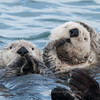 "Sea Otter © 2010 C. M. Neri.  Moss Landing, CA SEOT  <div class=""ss-paypal-button""><div class=""ss-paypal-add-to-cart-section""><div class=""ss-paypal-product-options""><h4>Mat Sizes</h4><ul><li><a href=""https://www.paypal.com/cgi-bin/webscr?cmd=_cart&amp;business=T77V5VKCW4K2U&amp;lc=US&amp;item_name=Sea%20Otter%20%C2%A9%202010%20C.%20M.%20Neri.%20%20Moss%20Landing%2C%20CA%20SEOT&amp;item_number=http%3A%2F%2Fwww.nightflightimages.com%2FGalleries-1%2FTravels%2Fi-TrbrQJF&amp;button_subtype=products&amp;no_note=0&amp;cn=Add%20special%20instructions%20to%20the%20seller%3A&amp;no_shipping=2&amp;currency_code=USD&amp;weight_unit=lbs&amp;add=1&amp;bn=PP-ShopCartBF%3Abtn_cart_SM.gif%3ANonHosted&amp;on0=Mat%20Sizes&amp;option_select0=5%20x%207&amp;option_amount0=10.00&amp;option_select1=8%20x%2010&amp;option_amount1=18.00&amp;option_select2=11%20x%2014&amp;option_amount2=28.00&amp;option_select3=card&amp;option_amount3=4.00&amp;option_index=0&amp;charset=utf-8&amp;submit=&amp;os0=5%20x%207"" target=""paypal""><span>5 x 7 $11.00 USD</span><img src=""https://www.paypalobjects.com/en_US/i/btn/btn_cart_SM.gif""></a></li><li><a href=""https://www.paypal.com/cgi-bin/webscr?cmd=_cart&amp;business=T77V5VKCW4K2U&amp;lc=US&amp;item_name=Sea%20Otter%20%C2%A9%202010%20C.%20M.%20Neri.%20%20Moss%20Landing%2C%20CA%20SEOT&amp;item_number=http%3A%2F%2Fwww.nightflightimages.com%2FGalleries-1%2FTravels%2Fi-TrbrQJF&amp;button_subtype=products&amp;no_note=0&amp;cn=Add%20special%20instructions%20to%20the%20seller%3A&amp;no_shipping=2&amp;currency_code=USD&amp;weight_unit=lbs&amp;add=1&amp;bn=PP-ShopCartBF%3Abtn_cart_SM.gif%3ANonHosted&amp;on0=Mat%20Sizes&amp;option_select0=5%20x%207&amp;option_amount0=10.00&amp;option_select1=8%20x%2010&amp;option_amount1=18.00&amp;option_select2=11%20x%2014&amp;option_amount2=28.00&amp;option_select3=card&amp;option_amount3=4.00&amp;option_index=0&amp;charset=utf-8&amp;submit=&amp;os0=8%20x%2010"" target=""paypal""><span>8 x 10 $19.00 USD</span><img src=""https://www.paypalobjects.com/en_US/i/btn/btn_cart_SM.gif""></a></li><li><a href=""https://www.paypal.com/cgi-bin/webscr?cmd=_cart&amp;business=T77V5VKCW4K2U&amp;lc=US&amp;item_name=Sea%20Otter%20%C2%A9%202010%20C.%20M.%20Neri.%20%20Moss%20Landing%2C%20CA%20SEOT&amp;item_number=http%3A%2F%2Fwww.nightflightimages.com%2FGalleries-1%2FTravels%2Fi-TrbrQJF&amp;button_subtype=products&amp;no_note=0&amp;cn=Add%20special%20instructions%20to%20the%20seller%3A&amp;no_shipping=2&amp;currency_code=USD&amp;weight_unit=lbs&amp;add=1&amp;bn=PP-ShopCartBF%3Abtn_cart_SM.gif%3ANonHosted&amp;on0=Mat%20Sizes&amp;option_select0=5%20x%207&amp;option_amount0=10.00&amp;option_select1=8%20x%2010&amp;option_amount1=18.00&amp;option_select2=11%20x%2014&amp;option_amount2=28.00&amp;option_select3=card&amp;option_amount3=4.00&amp;option_index=0&amp;charset=utf-8&amp;submit=&amp;os0=11%20x%2014"" target=""paypal""><span>11 x 14 $29.00 USD</span><img src=""https://www.paypalobjects.com/en_US/i/btn/btn_cart_SM.gif""></a></li><li><a href=""https://www.paypal.com/cgi-bin/webscr?cmd=_cart&amp;business=T77V5VKCW4K2U&amp;lc=US&amp;item_name=Sea%20Otter%20%C2%A9%202010%20C.%20M.%20Neri.%20%20Moss%20Landing%2C%20CA%20SEOT&amp;item_number=http%3A%2F%2Fwww.nightflightimages.com%2FGalleries-1%2FTravels%2Fi-TrbrQJF&amp;button_subtype=products&amp;no_note=0&amp;cn=Add%20special%20instructions%20to%20the%20seller%3A&amp;no_shipping=2&amp;currency_code=USD&amp;weight_unit=lbs&amp;add=1&amp;bn=PP-ShopCartBF%3Abtn_cart_SM.gif%3ANonHosted&amp;on0=Mat%20Sizes&amp;option_select0=5%20x%207&amp;option_amount0=10.00&amp;option_select1=8%20x%2010&amp;option_amount1=18.00&amp;option_select2=11%20x%2014&amp;option_amount2=28.00&amp;option_select3=card&amp;option_amount3=4.00&amp;option_index=0&amp;charset=utf-8&amp;submit=&amp;os0=card"" target=""paypal""><span>card $5.00 USD</span><img src=""https://www.paypalobjects.com/en_US/i/btn/btn_cart_SM.gif""></a></li></ul></div></div> <div class=""ss-paypal-view-cart-section""><a href=""https://www.paypal.com/cgi-bin/webscr?cmd=_cart&amp;business=T77V5VKCW4K2U&amp;display=1&amp;item_name=Sea%20Otter%20%C2%A9%202010%20C.%20M.%20Neri.%20%20Moss%20Landing%2C%20CA%20SEOT&amp;item_number=http%3A%2F%2Fwww.nightflightimages.com%2FGalleries-1%2FTravels%2Fi-TrbrQJF&amp;charset=utf-8&amp;submit="" target=""paypal"" class=""ss-paypal-submit-button""><img src=""https://www.paypalobjects.com/en_US/i/btn/btn_viewcart_LG.gif""></a></div></div><div class=""ss-paypal-button-end""></div>"