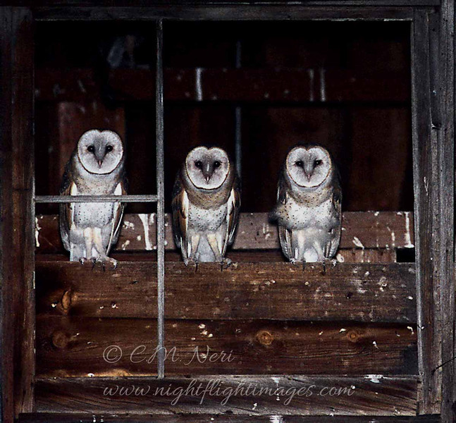 "Barn Owls  © 2004 C. M. Neri Klamath Basin, CA BNOWS  <div class=""ss-paypal-button""><div class=""ss-paypal-add-to-cart-section""><div class=""ss-paypal-product-options""><h4>Mat Sizes</h4><ul><li><a href=""https://www.paypal.com/cgi-bin/webscr?cmd=_cart&business=T77V5VKCW4K2U&lc=US&item_name=Barn%20Owls%20%20%C2%A9%202004%20C.%20M.%20Neri%20Klamath%20Basin%2C%20CA%20BNOWS&item_number=http%3A%2F%2Fwww.nightflightimages.com%2FGalleries-1%2FTravels%2Fi-VCzKmVH&button_subtype=products&no_note=0&cn=Add%20special%20instructions%20to%20the%20seller%3A&no_shipping=2&currency_code=USD&weight_unit=lbs&add=1&bn=PP-ShopCartBF%3Abtn_cart_SM.gif%3ANonHosted&on0=Mat%20Sizes&option_select0=5%20x%207&option_amount0=10.00&option_select1=8%20x%2010&option_amount1=18.00&option_select2=11%20x%2014&option_amount2=28.00&option_select3=card&option_amount3=4.00&option_index=0&charset=utf-8&submit=&os0=5%20x%207"" target=""paypal""><span>5 x 7 $11.00 USD</span><img src=""https://www.paypalobjects.com/en_US/i/btn/btn_cart_SM.gif""></a></li><li><a href=""https://www.paypal.com/cgi-bin/webscr?cmd=_cart&business=T77V5VKCW4K2U&lc=US&item_name=Barn%20Owls%20%20%C2%A9%202004%20C.%20M.%20Neri%20Klamath%20Basin%2C%20CA%20BNOWS&item_number=http%3A%2F%2Fwww.nightflightimages.com%2FGalleries-1%2FTravels%2Fi-VCzKmVH&button_subtype=products&no_note=0&cn=Add%20special%20instructions%20to%20the%20seller%3A&no_shipping=2&currency_code=USD&weight_unit=lbs&add=1&bn=PP-ShopCartBF%3Abtn_cart_SM.gif%3ANonHosted&on0=Mat%20Sizes&option_select0=5%20x%207&option_amount0=10.00&option_select1=8%20x%2010&option_amount1=18.00&option_select2=11%20x%2014&option_amount2=28.00&option_select3=card&option_amount3=4.00&option_index=0&charset=utf-8&submit=&os0=8%20x%2010"" target=""paypal""><span>8 x 10 $19.00 USD</span><img src=""https://www.paypalobjects.com/en_US/i/btn/btn_cart_SM.gif""></a></li><li><a href=""https://www.paypal.com/cgi-bin/webscr?cmd=_cart&business=T77V5VKCW4K2U&lc=US&item_name=Barn%20Owls%20%20%C2%A9%202004%20C.%20M.%20Neri%20Klamath%20Basin%2C%20CA%20BNOWS&item_number=http%3A%2F%2Fwww.nightflightimages.com%2FGalleries-1%2FTravels%2Fi-VCzKmVH&button_subtype=products&no_note=0&cn=Add%20special%20instructions%20to%20the%20seller%3A&no_shipping=2&currency_code=USD&weight_unit=lbs&add=1&bn=PP-ShopCartBF%3Abtn_cart_SM.gif%3ANonHosted&on0=Mat%20Sizes&option_select0=5%20x%207&option_amount0=10.00&option_select1=8%20x%2010&option_amount1=18.00&option_select2=11%20x%2014&option_amount2=28.00&option_select3=card&option_amount3=4.00&option_index=0&charset=utf-8&submit=&os0=11%20x%2014"" target=""paypal""><span>11 x 14 $29.00 USD</span><img src=""https://www.paypalobjects.com/en_US/i/btn/btn_cart_SM.gif""></a></li><li><a href=""https://www.paypal.com/cgi-bin/webscr?cmd=_cart&business=T77V5VKCW4K2U&lc=US&item_name=Barn%20Owls%20%20%C2%A9%202004%20C.%20M.%20Neri%20Klamath%20Basin%2C%20CA%20BNOWS&item_number=http%3A%2F%2Fwww.nightflightimages.com%2FGalleries-1%2FTravels%2Fi-VCzKmVH&button_subtype=products&no_note=0&cn=Add%20special%20instructions%20to%20the%20seller%3A&no_shipping=2&currency_code=USD&weight_unit=lbs&add=1&bn=PP-ShopCartBF%3Abtn_cart_SM.gif%3ANonHosted&on0=Mat%20Sizes&option_select0=5%20x%207&option_amount0=10.00&option_select1=8%20x%2010&option_amount1=18.00&option_select2=11%20x%2014&option_amount2=28.00&option_select3=card&option_amount3=4.00&option_index=0&charset=utf-8&submit=&os0=card"" target=""paypal""><span>card $5.00 USD</span><img src=""https://www.paypalobjects.com/en_US/i/btn/btn_cart_SM.gif""></a></li></ul></div></div> <div class=""ss-paypal-view-cart-section""><a href=""https://www.paypal.com/cgi-bin/webscr?cmd=_cart&business=T77V5VKCW4K2U&display=1&item_name=Barn%20Owls%20%20%C2%A9%202004%20C.%20M.%20Neri%20Klamath%20Basin%2C%20CA%20BNOWS&item_number=http%3A%2F%2Fwww.nightflightimages.com%2FGalleries-1%2FTravels%2Fi-VCzKmVH&charset=utf-8&submit="" target=""paypal"" class=""ss-paypal-submit-button""><img src=""https://www.paypalobjects.com/en_US/i/btn/btn_viewcart_LG.gif""></a></div></div><div class=""ss-paypal-button-end""></div>"