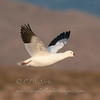 "Ross's Goose © 2011 C. M. Neri Bosque Del Apache NWR, NM ROGONM  <div class=""ss-paypal-button""><div class=""ss-paypal-add-to-cart-section""><div class=""ss-paypal-product-options""><h4>Mat Sizes</h4><ul><li><a href=""https://www.paypal.com/cgi-bin/webscr?cmd=_cart&business=T77V5VKCW4K2U&lc=US&item_name=Ross's%20Goose%20%C2%A9%202011%20C.%20M.%20Neri%20Bosque%20Del%20Apache%20NWR%2C%20NM%20ROGONM&item_number=http%3A%2F%2Fwww.nightflightimages.com%2FGalleries-1%2FTravels%2Fi-XcHW5FT&button_subtype=products&no_note=0&cn=Add%20special%20instructions%20to%20the%20seller%3A&no_shipping=2&currency_code=USD&weight_unit=lbs&add=1&bn=PP-ShopCartBF%3Abtn_cart_SM.gif%3ANonHosted&on0=Mat%20Sizes&option_select0=5%20x%207&option_amount0=10.00&option_select1=8%20x%2010&option_amount1=18.00&option_select2=11%20x%2014&option_amount2=28.00&option_select3=card&option_amount3=4.00&option_index=0&charset=utf-8&submit=&os0=5%20x%207"" target=""paypal""><span>5 x 7 $11.00 USD</span><img src=""https://www.paypalobjects.com/en_US/i/btn/btn_cart_SM.gif""></a></li><li><a href=""https://www.paypal.com/cgi-bin/webscr?cmd=_cart&business=T77V5VKCW4K2U&lc=US&item_name=Ross's%20Goose%20%C2%A9%202011%20C.%20M.%20Neri%20Bosque%20Del%20Apache%20NWR%2C%20NM%20ROGONM&item_number=http%3A%2F%2Fwww.nightflightimages.com%2FGalleries-1%2FTravels%2Fi-XcHW5FT&button_subtype=products&no_note=0&cn=Add%20special%20instructions%20to%20the%20seller%3A&no_shipping=2&currency_code=USD&weight_unit=lbs&add=1&bn=PP-ShopCartBF%3Abtn_cart_SM.gif%3ANonHosted&on0=Mat%20Sizes&option_select0=5%20x%207&option_amount0=10.00&option_select1=8%20x%2010&option_amount1=18.00&option_select2=11%20x%2014&option_amount2=28.00&option_select3=card&option_amount3=4.00&option_index=0&charset=utf-8&submit=&os0=8%20x%2010"" target=""paypal""><span>8 x 10 $19.00 USD</span><img src=""https://www.paypalobjects.com/en_US/i/btn/btn_cart_SM.gif""></a></li><li><a href=""https://www.paypal.com/cgi-bin/webscr?cmd=_cart&business=T77V5VKCW4K2U&lc=US&item_name=Ross's%20Goose%20%C2%A9%202011%20C.%20M.%20Neri%20Bosque%20Del%20Apache%20NWR%2C%20NM%20ROGONM&item_number=http%3A%2F%2Fwww.nightflightimages.com%2FGalleries-1%2FTravels%2Fi-XcHW5FT&button_subtype=products&no_note=0&cn=Add%20special%20instructions%20to%20the%20seller%3A&no_shipping=2&currency_code=USD&weight_unit=lbs&add=1&bn=PP-ShopCartBF%3Abtn_cart_SM.gif%3ANonHosted&on0=Mat%20Sizes&option_select0=5%20x%207&option_amount0=10.00&option_select1=8%20x%2010&option_amount1=18.00&option_select2=11%20x%2014&option_amount2=28.00&option_select3=card&option_amount3=4.00&option_index=0&charset=utf-8&submit=&os0=11%20x%2014"" target=""paypal""><span>11 x 14 $29.00 USD</span><img src=""https://www.paypalobjects.com/en_US/i/btn/btn_cart_SM.gif""></a></li><li><a href=""https://www.paypal.com/cgi-bin/webscr?cmd=_cart&business=T77V5VKCW4K2U&lc=US&item_name=Ross's%20Goose%20%C2%A9%202011%20C.%20M.%20Neri%20Bosque%20Del%20Apache%20NWR%2C%20NM%20ROGONM&item_number=http%3A%2F%2Fwww.nightflightimages.com%2FGalleries-1%2FTravels%2Fi-XcHW5FT&button_subtype=products&no_note=0&cn=Add%20special%20instructions%20to%20the%20seller%3A&no_shipping=2&currency_code=USD&weight_unit=lbs&add=1&bn=PP-ShopCartBF%3Abtn_cart_SM.gif%3ANonHosted&on0=Mat%20Sizes&option_select0=5%20x%207&option_amount0=10.00&option_select1=8%20x%2010&option_amount1=18.00&option_select2=11%20x%2014&option_amount2=28.00&option_select3=card&option_amount3=4.00&option_index=0&charset=utf-8&submit=&os0=card"" target=""paypal""><span>card $5.00 USD</span><img src=""https://www.paypalobjects.com/en_US/i/btn/btn_cart_SM.gif""></a></li></ul></div></div> <div class=""ss-paypal-view-cart-section""><a href=""https://www.paypal.com/cgi-bin/webscr?cmd=_cart&business=T77V5VKCW4K2U&display=1&item_name=Ross's%20Goose%20%C2%A9%202011%20C.%20M.%20Neri%20Bosque%20Del%20Apache%20NWR%2C%20NM%20ROGONM&item_number=http%3A%2F%2Fwww.nightflightimages.com%2FGalleries-1%2FTravels%2Fi-XcHW5FT&charset=utf-8&submit="" target=""paypal"" class=""ss-paypal-submit-button""><img src=""https://www.paypalobjects.com/en_US/i/btn/btn_viewcart_LG.gif""></a></div></div><div class=""ss-paypal-button-end""></div>"