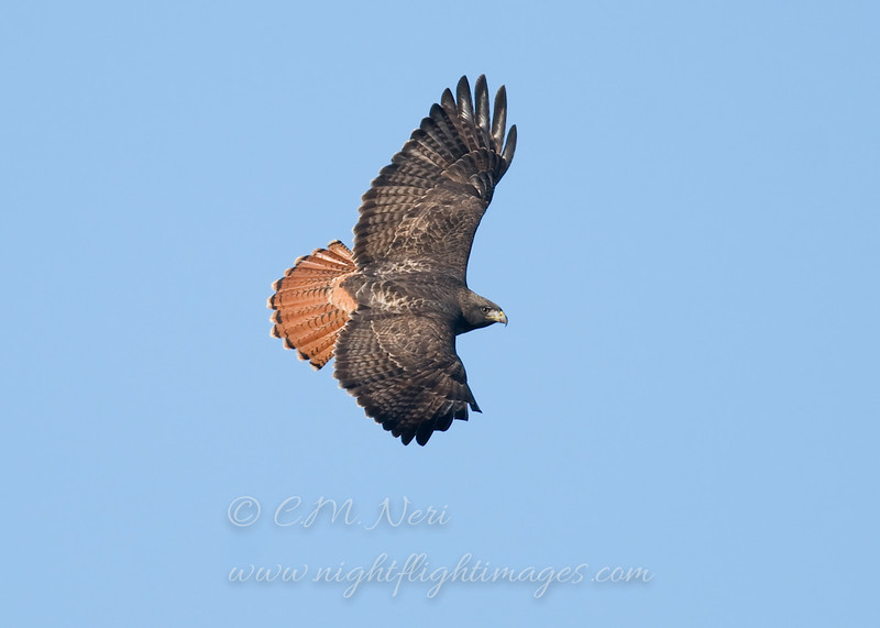 """Red-tailed Hawk © 2010 C. M. Neri.  Bodega Head, CA RTHACAUP2  <div class=""""ss-paypal-button""""><div class=""""ss-paypal-add-to-cart-section""""><div class=""""ss-paypal-product-options""""><h4>Mat Sizes</h4><ul><li><a href=""""https://www.paypal.com/cgi-bin/webscr?cmd=_cart&amp;business=T77V5VKCW4K2U&amp;lc=US&amp;item_name=Red-tailed%20Hawk%20%C2%A9%202010%20C.%20M.%20Neri.%20%20Bodega%20Head%2C%20CA%20RTHACAUP2&amp;item_number=http%3A%2F%2Fwww.nightflightimages.com%2FGalleries-1%2FTravels%2Fi-ZGNLWg2&amp;button_subtype=products&amp;no_note=0&amp;cn=Add%20special%20instructions%20to%20the%20seller%3A&amp;no_shipping=2&amp;currency_code=USD&amp;weight_unit=lbs&amp;add=1&amp;bn=PP-ShopCartBF%3Abtn_cart_SM.gif%3ANonHosted&amp;on0=Mat%20Sizes&amp;option_select0=5%20x%207&amp;option_amount0=10.00&amp;option_select1=8%20x%2010&amp;option_amount1=18.00&amp;option_select2=11%20x%2014&amp;option_amount2=28.00&amp;option_select3=card&amp;option_amount3=4.00&amp;option_index=0&amp;charset=utf-8&amp;submit=&amp;os0=5%20x%207"""" target=""""paypal""""><span>5 x 7 $11.00 USD</span><img src=""""https://www.paypalobjects.com/en_US/i/btn/btn_cart_SM.gif""""></a></li><li><a href=""""https://www.paypal.com/cgi-bin/webscr?cmd=_cart&amp;business=T77V5VKCW4K2U&amp;lc=US&amp;item_name=Red-tailed%20Hawk%20%C2%A9%202010%20C.%20M.%20Neri.%20%20Bodega%20Head%2C%20CA%20RTHACAUP2&amp;item_number=http%3A%2F%2Fwww.nightflightimages.com%2FGalleries-1%2FTravels%2Fi-ZGNLWg2&amp;button_subtype=products&amp;no_note=0&amp;cn=Add%20special%20instructions%20to%20the%20seller%3A&amp;no_shipping=2&amp;currency_code=USD&amp;weight_unit=lbs&amp;add=1&amp;bn=PP-ShopCartBF%3Abtn_cart_SM.gif%3ANonHosted&amp;on0=Mat%20Sizes&amp;option_select0=5%20x%207&amp;option_amount0=10.00&amp;option_select1=8%20x%2010&amp;option_amount1=18.00&amp;option_select2=11%20x%2014&amp;option_amount2=28.00&amp;option_select3=card&amp;option_amount3=4.00&amp;option_index=0&amp;charset=utf-8&amp;submit=&amp;os0=8%20x%2010"""" target=""""paypal""""><span>8 x 10 $19.00 USD</span"""