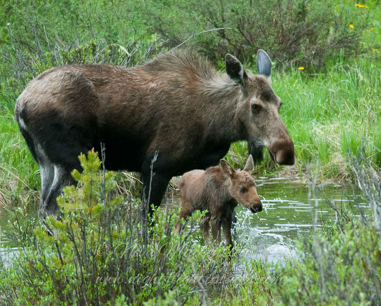 """Moose with baby © 2009 Nova Mackentley Rocky Mtn NP, CO MWB  <div class=""""ss-paypal-button""""><div class=""""ss-paypal-add-to-cart-section""""><div class=""""ss-paypal-product-options""""><h4>Mat Sizes</h4><ul><li><a href=""""https://www.paypal.com/cgi-bin/webscr?cmd=_cart&amp;business=T77V5VKCW4K2U&amp;lc=US&amp;item_name=Moose%20with%20baby%20%C2%A9%202009%20Nova%20Mackentley%20Rocky%20Mtn%20NP%2C%20CO%20MWB&amp;item_number=http%3A%2F%2Fwww.nightflightimages.com%2FGalleries-1%2FTravels%2Fi-cKpLXzR&amp;button_subtype=products&amp;no_note=0&amp;cn=Add%20special%20instructions%20to%20the%20seller%3A&amp;no_shipping=2&amp;currency_code=USD&amp;weight_unit=lbs&amp;add=1&amp;bn=PP-ShopCartBF%3Abtn_cart_SM.gif%3ANonHosted&amp;on0=Mat%20Sizes&amp;option_select0=5%20x%207&amp;option_amount0=10.00&amp;option_select1=8%20x%2010&amp;option_amount1=18.00&amp;option_select2=11%20x%2014&amp;option_amount2=28.00&amp;option_select3=card&amp;option_amount3=4.00&amp;option_index=0&amp;charset=utf-8&amp;submit=&amp;os0=5%20x%207"""" target=""""paypal""""><span>5 x 7 $11.00 USD</span><img src=""""https://www.paypalobjects.com/en_US/i/btn/btn_cart_SM.gif""""></a></li><li><a href=""""https://www.paypal.com/cgi-bin/webscr?cmd=_cart&amp;business=T77V5VKCW4K2U&amp;lc=US&amp;item_name=Moose%20with%20baby%20%C2%A9%202009%20Nova%20Mackentley%20Rocky%20Mtn%20NP%2C%20CO%20MWB&amp;item_number=http%3A%2F%2Fwww.nightflightimages.com%2FGalleries-1%2FTravels%2Fi-cKpLXzR&amp;button_subtype=products&amp;no_note=0&amp;cn=Add%20special%20instructions%20to%20the%20seller%3A&amp;no_shipping=2&amp;currency_code=USD&amp;weight_unit=lbs&amp;add=1&amp;bn=PP-ShopCartBF%3Abtn_cart_SM.gif%3ANonHosted&amp;on0=Mat%20Sizes&amp;option_select0=5%20x%207&amp;option_amount0=10.00&amp;option_select1=8%20x%2010&amp;option_amount1=18.00&amp;option_select2=11%20x%2014&amp;option_amount2=28.00&amp;option_select3=card&amp;option_amount3=4.00&amp;option_index=0&amp;charset=utf-8&amp;submit=&amp;os0=8%20x%2010"""" target=""""paypal""""><span>8 x 10 $19.00 USD</span><img """