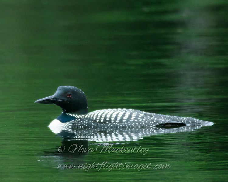 "Loon on lake © 2016 Nova Mackentley Somewhere in WI. LOL  <div class=""ss-paypal-button""><div class=""ss-paypal-add-to-cart-section""><div class=""ss-paypal-product-options""><h4>Mat Sizes</h4><ul><li><a href=""https://www.paypal.com/cgi-bin/webscr?cmd=_cart&business=T77V5VKCW4K2U&lc=US&item_name=Loon%20on%20lake%20%C2%A9%202016%20Nova%20Mackentley%20Somewhere%20in%20WI.%20LOL&item_number=http%3A%2F%2Fwww.nightflightimages.com%2FGalleries-1%2FTravels%2Fi-gcSc72f&button_subtype=products&no_note=0&cn=Add%20special%20instructions%20to%20the%20seller%3A&no_shipping=2&currency_code=USD&weight_unit=lbs&add=1&bn=PP-ShopCartBF%3Abtn_cart_SM.gif%3ANonHosted&on0=Mat%20Sizes&option_select0=5%20x%207&option_amount0=10.00&option_select1=8%20x%2010&option_amount1=18.00&option_select2=11%20x%2014&option_amount2=28.00&option_select3=card&option_amount3=4.00&option_index=0&charset=utf-8&submit=&os0=5%20x%207"" target=""paypal""><span>5 x 7 $11.00 USD</span><img src=""https://www.paypalobjects.com/en_US/i/btn/btn_cart_SM.gif""></a></li><li><a href=""https://www.paypal.com/cgi-bin/webscr?cmd=_cart&business=T77V5VKCW4K2U&lc=US&item_name=Loon%20on%20lake%20%C2%A9%202016%20Nova%20Mackentley%20Somewhere%20in%20WI.%20LOL&item_number=http%3A%2F%2Fwww.nightflightimages.com%2FGalleries-1%2FTravels%2Fi-gcSc72f&button_subtype=products&no_note=0&cn=Add%20special%20instructions%20to%20the%20seller%3A&no_shipping=2&currency_code=USD&weight_unit=lbs&add=1&bn=PP-ShopCartBF%3Abtn_cart_SM.gif%3ANonHosted&on0=Mat%20Sizes&option_select0=5%20x%207&option_amount0=10.00&option_select1=8%20x%2010&option_amount1=18.00&option_select2=11%20x%2014&option_amount2=28.00&option_select3=card&option_amount3=4.00&option_index=0&charset=utf-8&submit=&os0=8%20x%2010"" target=""paypal""><span>8 x 10 $19.00 USD</span><img src=""https://www.paypalobjects.com/en_US/i/btn/btn_cart_SM.gif""></a></li><li><a href=""https://www.paypal.com/cgi-bin/webscr?cmd=_cart&business=T77V5VKCW4K2U&lc=US&item_name=Loon%20on%20lake%20%C2%A9%202016%20Nova%20Mackentley%20Somewhere%20in%20WI.%20LOL&item_number=http%3A%2F%2Fwww.nightflightimages.com%2FGalleries-1%2FTravels%2Fi-gcSc72f&button_subtype=products&no_note=0&cn=Add%20special%20instructions%20to%20the%20seller%3A&no_shipping=2&currency_code=USD&weight_unit=lbs&add=1&bn=PP-ShopCartBF%3Abtn_cart_SM.gif%3ANonHosted&on0=Mat%20Sizes&option_select0=5%20x%207&option_amount0=10.00&option_select1=8%20x%2010&option_amount1=18.00&option_select2=11%20x%2014&option_amount2=28.00&option_select3=card&option_amount3=4.00&option_index=0&charset=utf-8&submit=&os0=11%20x%2014"" target=""paypal""><span>11 x 14 $29.00 USD</span><img src=""https://www.paypalobjects.com/en_US/i/btn/btn_cart_SM.gif""></a></li><li><a href=""https://www.paypal.com/cgi-bin/webscr?cmd=_cart&business=T77V5VKCW4K2U&lc=US&item_name=Loon%20on%20lake%20%C2%A9%202016%20Nova%20Mackentley%20Somewhere%20in%20WI.%20LOL&item_number=http%3A%2F%2Fwww.nightflightimages.com%2FGalleries-1%2FTravels%2Fi-gcSc72f&button_subtype=products&no_note=0&cn=Add%20special%20instructions%20to%20the%20seller%3A&no_shipping=2&currency_code=USD&weight_unit=lbs&add=1&bn=PP-ShopCartBF%3Abtn_cart_SM.gif%3ANonHosted&on0=Mat%20Sizes&option_select0=5%20x%207&option_amount0=10.00&option_select1=8%20x%2010&option_amount1=18.00&option_select2=11%20x%2014&option_amount2=28.00&option_select3=card&option_amount3=4.00&option_index=0&charset=utf-8&submit=&os0=card"" target=""paypal""><span>card $5.00 USD</span><img src=""https://www.paypalobjects.com/en_US/i/btn/btn_cart_SM.gif""></a></li></ul></div></div> <div class=""ss-paypal-view-cart-section""><a href=""https://www.paypal.com/cgi-bin/webscr?cmd=_cart&business=T77V5VKCW4K2U&display=1&item_name=Loon%20on%20lake%20%C2%A9%202016%20Nova%20Mackentley%20Somewhere%20in%20WI.%20LOL&item_number=http%3A%2F%2Fwww.nightflightimages.com%2FGalleries-1%2FTravels%2Fi-gcSc72f&charset=utf-8&submit="" target=""paypal"" class=""ss-paypal-submit-button""><img src=""https://www.paypalobjects.com/en_US/i/btn/btn_viewcart_LG.gif""></a></div></div><div class=""ss-paypal-button-end""></div>"