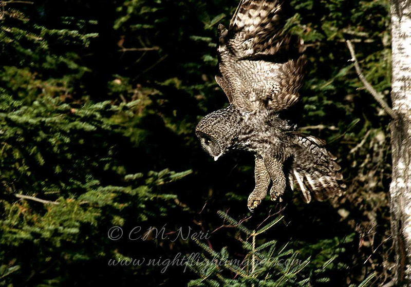 """Great Gray Owl Snowy Owl  © 2004 C. M. Neri  Sax-Zim Bog, MN GGOWDROP  <div class=""""ss-paypal-button""""><div class=""""ss-paypal-add-to-cart-section""""><div class=""""ss-paypal-product-options""""><h4>Mat Sizes</h4><ul><li><a href=""""https://www.paypal.com/cgi-bin/webscr?cmd=_cart&amp;business=T77V5VKCW4K2U&amp;lc=US&amp;item_name=Great%20Gray%20Owl%20Snowy%20Owl%20%20%C2%A9%202004%20C.%20M.%20Neri%20%20Sax-Zim%20Bog%2C%20MN%20GGOWDROP&amp;item_number=http%3A%2F%2Fwww.nightflightimages.com%2FGalleries-1%2FTravels%2Fi-hwKnsbg&amp;button_subtype=products&amp;no_note=0&amp;cn=Add%20special%20instructions%20to%20the%20seller%3A&amp;no_shipping=2&amp;currency_code=USD&amp;weight_unit=lbs&amp;add=1&amp;bn=PP-ShopCartBF%3Abtn_cart_SM.gif%3ANonHosted&amp;on0=Mat%20Sizes&amp;option_select0=5%20x%207&amp;option_amount0=10.00&amp;option_select1=8%20x%2010&amp;option_amount1=18.00&amp;option_select2=11%20x%2014&amp;option_amount2=28.00&amp;option_select3=card&amp;option_amount3=4.00&amp;option_index=0&amp;charset=utf-8&amp;submit=&amp;os0=5%20x%207"""" target=""""paypal""""><span>5 x 7 $11.00 USD</span><img src=""""https://www.paypalobjects.com/en_US/i/btn/btn_cart_SM.gif""""></a></li><li><a href=""""https://www.paypal.com/cgi-bin/webscr?cmd=_cart&amp;business=T77V5VKCW4K2U&amp;lc=US&amp;item_name=Great%20Gray%20Owl%20Snowy%20Owl%20%20%C2%A9%202004%20C.%20M.%20Neri%20%20Sax-Zim%20Bog%2C%20MN%20GGOWDROP&amp;item_number=http%3A%2F%2Fwww.nightflightimages.com%2FGalleries-1%2FTravels%2Fi-hwKnsbg&amp;button_subtype=products&amp;no_note=0&amp;cn=Add%20special%20instructions%20to%20the%20seller%3A&amp;no_shipping=2&amp;currency_code=USD&amp;weight_unit=lbs&amp;add=1&amp;bn=PP-ShopCartBF%3Abtn_cart_SM.gif%3ANonHosted&amp;on0=Mat%20Sizes&amp;option_select0=5%20x%207&amp;option_amount0=10.00&amp;option_select1=8%20x%2010&amp;option_amount1=18.00&amp;option_select2=11%20x%2014&amp;option_amount2=28.00&amp;option_select3=card&amp;option_amount3=4.00&amp;option_index=0&amp;charset=utf-8&amp;submit=&amp;os0=8%20x%2010"""" targe"""