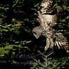 "Great Gray Owl Snowy Owl  © 2004 C. M. Neri  Sax-Zim Bog, MN GGOWDROP  <div class=""ss-paypal-button""><div class=""ss-paypal-add-to-cart-section""><div class=""ss-paypal-product-options""><h4>Mat Sizes</h4><ul><li><a href=""https://www.paypal.com/cgi-bin/webscr?cmd=_cart&amp;business=T77V5VKCW4K2U&amp;lc=US&amp;item_name=Great%20Gray%20Owl%20Snowy%20Owl%20%20%C2%A9%202004%20C.%20M.%20Neri%20%20Sax-Zim%20Bog%2C%20MN%20GGOWDROP&amp;item_number=http%3A%2F%2Fwww.nightflightimages.com%2FGalleries-1%2FTravels%2Fi-hwKnsbg&amp;button_subtype=products&amp;no_note=0&amp;cn=Add%20special%20instructions%20to%20the%20seller%3A&amp;no_shipping=2&amp;currency_code=USD&amp;weight_unit=lbs&amp;add=1&amp;bn=PP-ShopCartBF%3Abtn_cart_SM.gif%3ANonHosted&amp;on0=Mat%20Sizes&amp;option_select0=5%20x%207&amp;option_amount0=10.00&amp;option_select1=8%20x%2010&amp;option_amount1=18.00&amp;option_select2=11%20x%2014&amp;option_amount2=28.00&amp;option_select3=card&amp;option_amount3=4.00&amp;option_index=0&amp;charset=utf-8&amp;submit=&amp;os0=5%20x%207"" target=""paypal""><span>5 x 7 $11.00 USD</span><img src=""https://www.paypalobjects.com/en_US/i/btn/btn_cart_SM.gif""></a></li><li><a href=""https://www.paypal.com/cgi-bin/webscr?cmd=_cart&amp;business=T77V5VKCW4K2U&amp;lc=US&amp;item_name=Great%20Gray%20Owl%20Snowy%20Owl%20%20%C2%A9%202004%20C.%20M.%20Neri%20%20Sax-Zim%20Bog%2C%20MN%20GGOWDROP&amp;item_number=http%3A%2F%2Fwww.nightflightimages.com%2FGalleries-1%2FTravels%2Fi-hwKnsbg&amp;button_subtype=products&amp;no_note=0&amp;cn=Add%20special%20instructions%20to%20the%20seller%3A&amp;no_shipping=2&amp;currency_code=USD&amp;weight_unit=lbs&amp;add=1&amp;bn=PP-ShopCartBF%3Abtn_cart_SM.gif%3ANonHosted&amp;on0=Mat%20Sizes&amp;option_select0=5%20x%207&amp;option_amount0=10.00&amp;option_select1=8%20x%2010&amp;option_amount1=18.00&amp;option_select2=11%20x%2014&amp;option_amount2=28.00&amp;option_select3=card&amp;option_amount3=4.00&amp;option_index=0&amp;charset=utf-8&amp;submit=&amp;os0=8%20x%2010"" target=""paypal""><span>8 x 10 $19.00 USD</span><img src=""https://www.paypalobjects.com/en_US/i/btn/btn_cart_SM.gif""></a></li><li><a href=""https://www.paypal.com/cgi-bin/webscr?cmd=_cart&amp;business=T77V5VKCW4K2U&amp;lc=US&amp;item_name=Great%20Gray%20Owl%20Snowy%20Owl%20%20%C2%A9%202004%20C.%20M.%20Neri%20%20Sax-Zim%20Bog%2C%20MN%20GGOWDROP&amp;item_number=http%3A%2F%2Fwww.nightflightimages.com%2FGalleries-1%2FTravels%2Fi-hwKnsbg&amp;button_subtype=products&amp;no_note=0&amp;cn=Add%20special%20instructions%20to%20the%20seller%3A&amp;no_shipping=2&amp;currency_code=USD&amp;weight_unit=lbs&amp;add=1&amp;bn=PP-ShopCartBF%3Abtn_cart_SM.gif%3ANonHosted&amp;on0=Mat%20Sizes&amp;option_select0=5%20x%207&amp;option_amount0=10.00&amp;option_select1=8%20x%2010&amp;option_amount1=18.00&amp;option_select2=11%20x%2014&amp;option_amount2=28.00&amp;option_select3=card&amp;option_amount3=4.00&amp;option_index=0&amp;charset=utf-8&amp;submit=&amp;os0=11%20x%2014"" target=""paypal""><span>11 x 14 $29.00 USD</span><img src=""https://www.paypalobjects.com/en_US/i/btn/btn_cart_SM.gif""></a></li><li><a href=""https://www.paypal.com/cgi-bin/webscr?cmd=_cart&amp;business=T77V5VKCW4K2U&amp;lc=US&amp;item_name=Great%20Gray%20Owl%20Snowy%20Owl%20%20%C2%A9%202004%20C.%20M.%20Neri%20%20Sax-Zim%20Bog%2C%20MN%20GGOWDROP&amp;item_number=http%3A%2F%2Fwww.nightflightimages.com%2FGalleries-1%2FTravels%2Fi-hwKnsbg&amp;button_subtype=products&amp;no_note=0&amp;cn=Add%20special%20instructions%20to%20the%20seller%3A&amp;no_shipping=2&amp;currency_code=USD&amp;weight_unit=lbs&amp;add=1&amp;bn=PP-ShopCartBF%3Abtn_cart_SM.gif%3ANonHosted&amp;on0=Mat%20Sizes&amp;option_select0=5%20x%207&amp;option_amount0=10.00&amp;option_select1=8%20x%2010&amp;option_amount1=18.00&amp;option_select2=11%20x%2014&amp;option_amount2=28.00&amp;option_select3=card&amp;option_amount3=4.00&amp;option_index=0&amp;charset=utf-8&amp;submit=&amp;os0=card"" target=""paypal""><span>card $5.00 USD</span><img src=""https://www.paypalobjects.com/en_US/i/btn/btn_cart_SM.gif""></a></li></ul></div></div> <div class=""ss-paypal-view-cart-section""><a href=""https://www.paypal.com/cgi-bin/webscr?cmd=_cart&amp;business=T77V5VKCW4K2U&amp;display=1&amp;item_name=Great%20Gray%20Owl%20Snowy%20Owl%20%20%C2%A9%202004%20C.%20M.%20Neri%20%20Sax-Zim%20Bog%2C%20MN%20GGOWDROP&amp;item_number=http%3A%2F%2Fwww.nightflightimages.com%2FGalleries-1%2FTravels%2Fi-hwKnsbg&amp;charset=utf-8&amp;submit="" target=""paypal"" class=""ss-paypal-submit-button""><img src=""https://www.paypalobjects.com/en_US/i/btn/btn_viewcart_LG.gif""></a></div></div><div class=""ss-paypal-button-end""></div>"