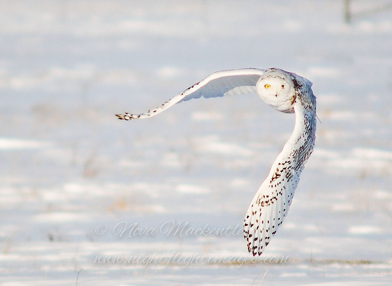 """Snowy Owl in flight © 2007 Nova Mackentley Amherst Island, ON SNF  <div class=""""ss-paypal-button""""><div class=""""ss-paypal-add-to-cart-section""""><div class=""""ss-paypal-product-options""""><h4>Mat Sizes</h4><ul><li><a href=""""https://www.paypal.com/cgi-bin/webscr?cmd=_cart&amp;business=T77V5VKCW4K2U&amp;lc=US&amp;item_name=Snowy%20Owl%20in%20flight%20%C2%A9%202007%20Nova%20Mackentley%20Amherst%20Island%2C%20ON%20SNF&amp;item_number=http%3A%2F%2Fwww.nightflightimages.com%2FGalleries-1%2FTravels%2Fi-jcGDsR5&amp;button_subtype=products&amp;no_note=0&amp;cn=Add%20special%20instructions%20to%20the%20seller%3A&amp;no_shipping=2&amp;currency_code=USD&amp;weight_unit=lbs&amp;add=1&amp;bn=PP-ShopCartBF%3Abtn_cart_SM.gif%3ANonHosted&amp;on0=Mat%20Sizes&amp;option_select0=5%20x%207&amp;option_amount0=10.00&amp;option_select1=8%20x%2010&amp;option_amount1=18.00&amp;option_select2=11%20x%2014&amp;option_amount2=28.00&amp;option_select3=card&amp;option_amount3=4.00&amp;option_index=0&amp;charset=utf-8&amp;submit=&amp;os0=5%20x%207"""" target=""""paypal""""><span>5 x 7 $11.00 USD</span><img src=""""https://www.paypalobjects.com/en_US/i/btn/btn_cart_SM.gif""""></a></li><li><a href=""""https://www.paypal.com/cgi-bin/webscr?cmd=_cart&amp;business=T77V5VKCW4K2U&amp;lc=US&amp;item_name=Snowy%20Owl%20in%20flight%20%C2%A9%202007%20Nova%20Mackentley%20Amherst%20Island%2C%20ON%20SNF&amp;item_number=http%3A%2F%2Fwww.nightflightimages.com%2FGalleries-1%2FTravels%2Fi-jcGDsR5&amp;button_subtype=products&amp;no_note=0&amp;cn=Add%20special%20instructions%20to%20the%20seller%3A&amp;no_shipping=2&amp;currency_code=USD&amp;weight_unit=lbs&amp;add=1&amp;bn=PP-ShopCartBF%3Abtn_cart_SM.gif%3ANonHosted&amp;on0=Mat%20Sizes&amp;option_select0=5%20x%207&amp;option_amount0=10.00&amp;option_select1=8%20x%2010&amp;option_amount1=18.00&amp;option_select2=11%20x%2014&amp;option_amount2=28.00&amp;option_select3=card&amp;option_amount3=4.00&amp;option_index=0&amp;charset=utf-8&amp;submit=&amp;os0=8%20x%2010"""" target=""""paypal""""><span>8 x 10 $19."""