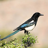 "Black-billed Magpie  © 2009 C. M. Neri Rocky Mountain National Park, CO BBMA  <div class=""ss-paypal-button""><div class=""ss-paypal-add-to-cart-section""><div class=""ss-paypal-product-options""><h4>Mat Sizes</h4><ul><li><a href=""https://www.paypal.com/cgi-bin/webscr?cmd=_cart&business=T77V5VKCW4K2U&lc=US&item_name=Black-billed%20Magpie%20%20%C2%A9%202009%20C.%20M.%20Neri%20Rocky%20Mountain%20National%20Park%2C%20CO%20BBMA&item_number=http%3A%2F%2Fwww.nightflightimages.com%2FGalleries-1%2FTravels%2Fi-k6DTnkw&button_subtype=products&no_note=0&cn=Add%20special%20instructions%20to%20the%20seller%3A&no_shipping=2&currency_code=USD&weight_unit=lbs&add=1&bn=PP-ShopCartBF%3Abtn_cart_SM.gif%3ANonHosted&on0=Mat%20Sizes&option_select0=5%20x%207&option_amount0=10.00&option_select1=8%20x%2010&option_amount1=18.00&option_select2=11%20x%2014&option_amount2=28.00&option_select3=card&option_amount3=4.00&option_index=0&charset=utf-8&submit=&os0=5%20x%207"" target=""paypal""><span>5 x 7 $11.00 USD</span><img src=""https://www.paypalobjects.com/en_US/i/btn/btn_cart_SM.gif""></a></li><li><a href=""https://www.paypal.com/cgi-bin/webscr?cmd=_cart&business=T77V5VKCW4K2U&lc=US&item_name=Black-billed%20Magpie%20%20%C2%A9%202009%20C.%20M.%20Neri%20Rocky%20Mountain%20National%20Park%2C%20CO%20BBMA&item_number=http%3A%2F%2Fwww.nightflightimages.com%2FGalleries-1%2FTravels%2Fi-k6DTnkw&button_subtype=products&no_note=0&cn=Add%20special%20instructions%20to%20the%20seller%3A&no_shipping=2&currency_code=USD&weight_unit=lbs&add=1&bn=PP-ShopCartBF%3Abtn_cart_SM.gif%3ANonHosted&on0=Mat%20Sizes&option_select0=5%20x%207&option_amount0=10.00&option_select1=8%20x%2010&option_amount1=18.00&option_select2=11%20x%2014&option_amount2=28.00&option_select3=card&option_amount3=4.00&option_index=0&charset=utf-8&submit=&os0=8%20x%2010"" target=""paypal""><span>8 x 10 $19.00 USD</span><img src=""https://www.paypalobjects.com/en_US/i/btn/btn_cart_SM.gif""></a></li><li><a href=""https://www.paypal.com/cgi-bin/webscr?cmd=_cart&business=T77V5VKCW4K2U&lc=US&item_name=Black-billed%20Magpie%20%20%C2%A9%202009%20C.%20M.%20Neri%20Rocky%20Mountain%20National%20Park%2C%20CO%20BBMA&item_number=http%3A%2F%2Fwww.nightflightimages.com%2FGalleries-1%2FTravels%2Fi-k6DTnkw&button_subtype=products&no_note=0&cn=Add%20special%20instructions%20to%20the%20seller%3A&no_shipping=2&currency_code=USD&weight_unit=lbs&add=1&bn=PP-ShopCartBF%3Abtn_cart_SM.gif%3ANonHosted&on0=Mat%20Sizes&option_select0=5%20x%207&option_amount0=10.00&option_select1=8%20x%2010&option_amount1=18.00&option_select2=11%20x%2014&option_amount2=28.00&option_select3=card&option_amount3=4.00&option_index=0&charset=utf-8&submit=&os0=11%20x%2014"" target=""paypal""><span>11 x 14 $29.00 USD</span><img src=""https://www.paypalobjects.com/en_US/i/btn/btn_cart_SM.gif""></a></li><li><a href=""https://www.paypal.com/cgi-bin/webscr?cmd=_cart&business=T77V5VKCW4K2U&lc=US&item_name=Black-billed%20Magpie%20%20%C2%A9%202009%20C.%20M.%20Neri%20Rocky%20Mountain%20National%20Park%2C%20CO%20BBMA&item_number=http%3A%2F%2Fwww.nightflightimages.com%2FGalleries-1%2FTravels%2Fi-k6DTnkw&button_subtype=products&no_note=0&cn=Add%20special%20instructions%20to%20the%20seller%3A&no_shipping=2&currency_code=USD&weight_unit=lbs&add=1&bn=PP-ShopCartBF%3Abtn_cart_SM.gif%3ANonHosted&on0=Mat%20Sizes&option_select0=5%20x%207&option_amount0=10.00&option_select1=8%20x%2010&option_amount1=18.00&option_select2=11%20x%2014&option_amount2=28.00&option_select3=card&option_amount3=4.00&option_index=0&charset=utf-8&submit=&os0=card"" target=""paypal""><span>card $5.00 USD</span><img src=""https://www.paypalobjects.com/en_US/i/btn/btn_cart_SM.gif""></a></li></ul></div></div> <div class=""ss-paypal-view-cart-section""><a href=""https://www.paypal.com/cgi-bin/webscr?cmd=_cart&business=T77V5VKCW4K2U&display=1&item_name=Black-billed%20Magpie%20%20%C2%A9%202009%20C.%20M.%20Neri%20Rocky%20Mountain%20National%20Park%2C%20CO%20BBMA&item_number=http%3A%2F%2Fwww.nightflightimages.com%2FGalleries-1%2FTravels%2Fi-k6DTnkw&charset=utf-8&submit="" target=""paypal"" class=""ss-paypal-submit-button""><img src=""https://www.paypalobjects.com/en_US/i/btn/btn_viewcart_LG.gif""></a></div></div><div class=""ss-paypal-button-end""></div>"