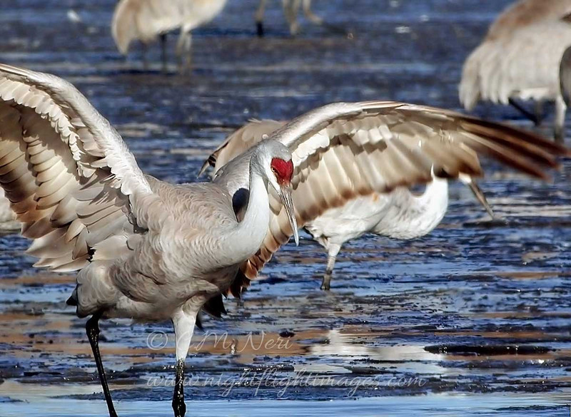 "Sandhill Crane  © 2000 C. M. Neri Bosque Del Apache NWR, NM SACR00  <div class=""ss-paypal-button""><div class=""ss-paypal-add-to-cart-section""><div class=""ss-paypal-product-options""><h4>Mat Sizes</h4><ul><li><a href=""https://www.paypal.com/cgi-bin/webscr?cmd=_cart&amp;business=T77V5VKCW4K2U&amp;lc=US&amp;item_name=Sandhill%20Crane%20%20%C2%A9%202000%20C.%20M.%20Neri%20Bosque%20Del%20Apache%20NWR%2C%20NM%20SACR00&amp;item_number=http%3A%2F%2Fwww.nightflightimages.com%2FGalleries-1%2FTravels%2Fi-kfjNFQZ&amp;button_subtype=products&amp;no_note=0&amp;cn=Add%20special%20instructions%20to%20the%20seller%3A&amp;no_shipping=2&amp;currency_code=USD&amp;weight_unit=lbs&amp;add=1&amp;bn=PP-ShopCartBF%3Abtn_cart_SM.gif%3ANonHosted&amp;on0=Mat%20Sizes&amp;option_select0=5%20x%207&amp;option_amount0=10.00&amp;option_select1=8%20x%2010&amp;option_amount1=18.00&amp;option_select2=11%20x%2014&amp;option_amount2=28.00&amp;option_select3=card&amp;option_amount3=4.00&amp;option_index=0&amp;charset=utf-8&amp;submit=&amp;os0=5%20x%207"" target=""paypal""><span>5 x 7 $11.00 USD</span><img src=""https://www.paypalobjects.com/en_US/i/btn/btn_cart_SM.gif""></a></li><li><a href=""https://www.paypal.com/cgi-bin/webscr?cmd=_cart&amp;business=T77V5VKCW4K2U&amp;lc=US&amp;item_name=Sandhill%20Crane%20%20%C2%A9%202000%20C.%20M.%20Neri%20Bosque%20Del%20Apache%20NWR%2C%20NM%20SACR00&amp;item_number=http%3A%2F%2Fwww.nightflightimages.com%2FGalleries-1%2FTravels%2Fi-kfjNFQZ&amp;button_subtype=products&amp;no_note=0&amp;cn=Add%20special%20instructions%20to%20the%20seller%3A&amp;no_shipping=2&amp;currency_code=USD&amp;weight_unit=lbs&amp;add=1&amp;bn=PP-ShopCartBF%3Abtn_cart_SM.gif%3ANonHosted&amp;on0=Mat%20Sizes&amp;option_select0=5%20x%207&amp;option_amount0=10.00&amp;option_select1=8%20x%2010&amp;option_amount1=18.00&amp;option_select2=11%20x%2014&amp;option_amount2=28.00&amp;option_select3=card&amp;option_amount3=4.00&amp;option_index=0&amp;charset=utf-8&amp;submit=&amp;os0=8%20x%2010"" target=""paypal""><span>8 x 10 $19.00 USD</span><img src=""https://www.paypalobjects.com/en_US/i/btn/btn_cart_SM.gif""></a></li><li><a href=""https://www.paypal.com/cgi-bin/webscr?cmd=_cart&amp;business=T77V5VKCW4K2U&amp;lc=US&amp;item_name=Sandhill%20Crane%20%20%C2%A9%202000%20C.%20M.%20Neri%20Bosque%20Del%20Apache%20NWR%2C%20NM%20SACR00&amp;item_number=http%3A%2F%2Fwww.nightflightimages.com%2FGalleries-1%2FTravels%2Fi-kfjNFQZ&amp;button_subtype=products&amp;no_note=0&amp;cn=Add%20special%20instructions%20to%20the%20seller%3A&amp;no_shipping=2&amp;currency_code=USD&amp;weight_unit=lbs&amp;add=1&amp;bn=PP-ShopCartBF%3Abtn_cart_SM.gif%3ANonHosted&amp;on0=Mat%20Sizes&amp;option_select0=5%20x%207&amp;option_amount0=10.00&amp;option_select1=8%20x%2010&amp;option_amount1=18.00&amp;option_select2=11%20x%2014&amp;option_amount2=28.00&amp;option_select3=card&amp;option_amount3=4.00&amp;option_index=0&amp;charset=utf-8&amp;submit=&amp;os0=11%20x%2014"" target=""paypal""><span>11 x 14 $29.00 USD</span><img src=""https://www.paypalobjects.com/en_US/i/btn/btn_cart_SM.gif""></a></li><li><a href=""https://www.paypal.com/cgi-bin/webscr?cmd=_cart&amp;business=T77V5VKCW4K2U&amp;lc=US&amp;item_name=Sandhill%20Crane%20%20%C2%A9%202000%20C.%20M.%20Neri%20Bosque%20Del%20Apache%20NWR%2C%20NM%20SACR00&amp;item_number=http%3A%2F%2Fwww.nightflightimages.com%2FGalleries-1%2FTravels%2Fi-kfjNFQZ&amp;button_subtype=products&amp;no_note=0&amp;cn=Add%20special%20instructions%20to%20the%20seller%3A&amp;no_shipping=2&amp;currency_code=USD&amp;weight_unit=lbs&amp;add=1&amp;bn=PP-ShopCartBF%3Abtn_cart_SM.gif%3ANonHosted&amp;on0=Mat%20Sizes&amp;option_select0=5%20x%207&amp;option_amount0=10.00&amp;option_select1=8%20x%2010&amp;option_amount1=18.00&amp;option_select2=11%20x%2014&amp;option_amount2=28.00&amp;option_select3=card&amp;option_amount3=4.00&amp;option_index=0&amp;charset=utf-8&amp;submit=&amp;os0=card"" target=""paypal""><span>card $5.00 USD</span><img src=""https://www.paypalobjects.com/en_US/i/btn/btn_cart_SM.gif""></a></li></ul></div></div> <div class=""ss-paypal-view-cart-section""><a href=""https://www.paypal.com/cgi-bin/webscr?cmd=_cart&amp;business=T77V5VKCW4K2U&amp;display=1&amp;item_name=Sandhill%20Crane%20%20%C2%A9%202000%20C.%20M.%20Neri%20Bosque%20Del%20Apache%20NWR%2C%20NM%20SACR00&amp;item_number=http%3A%2F%2Fwww.nightflightimages.com%2FGalleries-1%2FTravels%2Fi-kfjNFQZ&amp;charset=utf-8&amp;submit="" target=""paypal"" class=""ss-paypal-submit-button""><img src=""https://www.paypalobjects.com/en_US/i/btn/btn_viewcart_LG.gif""></a></div></div><div class=""ss-paypal-button-end""></div>"