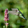 "Broad-tailed Hummingbird  © 2006 C. M. Neri Manzano Mountains, NM BTHUM  <div class=""ss-paypal-button""><div class=""ss-paypal-add-to-cart-section""><div class=""ss-paypal-product-options""><h4>Mat Sizes</h4><ul><li><a href=""https://www.paypal.com/cgi-bin/webscr?cmd=_cart&business=T77V5VKCW4K2U&lc=US&item_name=Broad-tailed%20Hummingbird%20%20%C2%A9%202006%20C.%20M.%20Neri%20Manzano%20Mountains%2C%20NM%20BTHUM&item_number=http%3A%2F%2Fwww.nightflightimages.com%2FGalleries-1%2FTravels%2Fi-mcZpjQC&button_subtype=products&no_note=0&cn=Add%20special%20instructions%20to%20the%20seller%3A&no_shipping=2&currency_code=USD&weight_unit=lbs&add=1&bn=PP-ShopCartBF%3Abtn_cart_SM.gif%3ANonHosted&on0=Mat%20Sizes&option_select0=5%20x%207&option_amount0=10.00&option_select1=8%20x%2010&option_amount1=18.00&option_select2=11%20x%2014&option_amount2=28.00&option_select3=card&option_amount3=4.00&option_index=0&charset=utf-8&submit=&os0=5%20x%207"" target=""paypal""><span>5 x 7 $11.00 USD</span><img src=""https://www.paypalobjects.com/en_US/i/btn/btn_cart_SM.gif""></a></li><li><a href=""https://www.paypal.com/cgi-bin/webscr?cmd=_cart&business=T77V5VKCW4K2U&lc=US&item_name=Broad-tailed%20Hummingbird%20%20%C2%A9%202006%20C.%20M.%20Neri%20Manzano%20Mountains%2C%20NM%20BTHUM&item_number=http%3A%2F%2Fwww.nightflightimages.com%2FGalleries-1%2FTravels%2Fi-mcZpjQC&button_subtype=products&no_note=0&cn=Add%20special%20instructions%20to%20the%20seller%3A&no_shipping=2&currency_code=USD&weight_unit=lbs&add=1&bn=PP-ShopCartBF%3Abtn_cart_SM.gif%3ANonHosted&on0=Mat%20Sizes&option_select0=5%20x%207&option_amount0=10.00&option_select1=8%20x%2010&option_amount1=18.00&option_select2=11%20x%2014&option_amount2=28.00&option_select3=card&option_amount3=4.00&option_index=0&charset=utf-8&submit=&os0=8%20x%2010"" target=""paypal""><span>8 x 10 $19.00 USD</span><img src=""https://www.paypalobjects.com/en_US/i/btn/btn_cart_SM.gif""></a></li><li><a href=""https://www.paypal.com/cgi-bin/webscr?cmd=_cart&business=T77V5VKCW4K2U&lc=US&item_name=Broad-tailed%20Hummingbird%20%20%C2%A9%202006%20C.%20M.%20Neri%20Manzano%20Mountains%2C%20NM%20BTHUM&item_number=http%3A%2F%2Fwww.nightflightimages.com%2FGalleries-1%2FTravels%2Fi-mcZpjQC&button_subtype=products&no_note=0&cn=Add%20special%20instructions%20to%20the%20seller%3A&no_shipping=2&currency_code=USD&weight_unit=lbs&add=1&bn=PP-ShopCartBF%3Abtn_cart_SM.gif%3ANonHosted&on0=Mat%20Sizes&option_select0=5%20x%207&option_amount0=10.00&option_select1=8%20x%2010&option_amount1=18.00&option_select2=11%20x%2014&option_amount2=28.00&option_select3=card&option_amount3=4.00&option_index=0&charset=utf-8&submit=&os0=11%20x%2014"" target=""paypal""><span>11 x 14 $29.00 USD</span><img src=""https://www.paypalobjects.com/en_US/i/btn/btn_cart_SM.gif""></a></li><li><a href=""https://www.paypal.com/cgi-bin/webscr?cmd=_cart&business=T77V5VKCW4K2U&lc=US&item_name=Broad-tailed%20Hummingbird%20%20%C2%A9%202006%20C.%20M.%20Neri%20Manzano%20Mountains%2C%20NM%20BTHUM&item_number=http%3A%2F%2Fwww.nightflightimages.com%2FGalleries-1%2FTravels%2Fi-mcZpjQC&button_subtype=products&no_note=0&cn=Add%20special%20instructions%20to%20the%20seller%3A&no_shipping=2&currency_code=USD&weight_unit=lbs&add=1&bn=PP-ShopCartBF%3Abtn_cart_SM.gif%3ANonHosted&on0=Mat%20Sizes&option_select0=5%20x%207&option_amount0=10.00&option_select1=8%20x%2010&option_amount1=18.00&option_select2=11%20x%2014&option_amount2=28.00&option_select3=card&option_amount3=4.00&option_index=0&charset=utf-8&submit=&os0=card"" target=""paypal""><span>card $5.00 USD</span><img src=""https://www.paypalobjects.com/en_US/i/btn/btn_cart_SM.gif""></a></li></ul></div></div> <div class=""ss-paypal-view-cart-section""><a href=""https://www.paypal.com/cgi-bin/webscr?cmd=_cart&business=T77V5VKCW4K2U&display=1&item_name=Broad-tailed%20Hummingbird%20%20%C2%A9%202006%20C.%20M.%20Neri%20Manzano%20Mountains%2C%20NM%20BTHUM&item_number=http%3A%2F%2Fwww.nightflightimages.com%2FGalleries-1%2FTravels%2Fi-mcZpjQC&charset=utf-8&submit="" target=""paypal"" class=""ss-paypal-submit-button""><img src=""https://www.paypalobjects.com/en_US/i/btn/btn_viewcart_LG.gif""></a></div></div><div class=""ss-paypal-button-end""></div>"