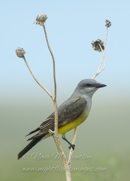 "Western Kingbird © 2016 Nova Mackentley Pawnee Grasslands, CO WEK  <div class=""ss-paypal-button""><div class=""ss-paypal-add-to-cart-section""><div class=""ss-paypal-product-options""><h4>Mat Sizes</h4><ul><li><a href=""https://www.paypal.com/cgi-bin/webscr?cmd=_cart&amp;business=T77V5VKCW4K2U&amp;lc=US&amp;item_name=Western%20Kingbird%20%C2%A9%202016%20Nova%20Mackentley%20Pawnee%20Grasslands%2C%20CO%20WEK&amp;item_number=http%3A%2F%2Fwww.nightflightimages.com%2FGalleries-1%2FTravels%2Fi-pjsjcwH&amp;button_subtype=products&amp;no_note=0&amp;cn=Add%20special%20instructions%20to%20the%20seller%3A&amp;no_shipping=2&amp;currency_code=USD&amp;weight_unit=lbs&amp;add=1&amp;bn=PP-ShopCartBF%3Abtn_cart_SM.gif%3ANonHosted&amp;on0=Mat%20Sizes&amp;option_select0=5%20x%207&amp;option_amount0=10.00&amp;option_select1=8%20x%2010&amp;option_amount1=18.00&amp;option_select2=11%20x%2014&amp;option_amount2=28.00&amp;option_select3=card&amp;option_amount3=4.00&amp;option_index=0&amp;charset=utf-8&amp;submit=&amp;os0=5%20x%207"" target=""paypal""><span>5 x 7 $11.00 USD</span><img src=""https://www.paypalobjects.com/en_US/i/btn/btn_cart_SM.gif""></a></li><li><a href=""https://www.paypal.com/cgi-bin/webscr?cmd=_cart&amp;business=T77V5VKCW4K2U&amp;lc=US&amp;item_name=Western%20Kingbird%20%C2%A9%202016%20Nova%20Mackentley%20Pawnee%20Grasslands%2C%20CO%20WEK&amp;item_number=http%3A%2F%2Fwww.nightflightimages.com%2FGalleries-1%2FTravels%2Fi-pjsjcwH&amp;button_subtype=products&amp;no_note=0&amp;cn=Add%20special%20instructions%20to%20the%20seller%3A&amp;no_shipping=2&amp;currency_code=USD&amp;weight_unit=lbs&amp;add=1&amp;bn=PP-ShopCartBF%3Abtn_cart_SM.gif%3ANonHosted&amp;on0=Mat%20Sizes&amp;option_select0=5%20x%207&amp;option_amount0=10.00&amp;option_select1=8%20x%2010&amp;option_amount1=18.00&amp;option_select2=11%20x%2014&amp;option_amount2=28.00&amp;option_select3=card&amp;option_amount3=4.00&amp;option_index=0&amp;charset=utf-8&amp;submit=&amp;os0=8%20x%2010"" target=""paypal""><span>8 x 10 $19.00 USD</span><img src=""https://www.paypalobjects.com/en_US/i/btn/btn_cart_SM.gif""></a></li><li><a href=""https://www.paypal.com/cgi-bin/webscr?cmd=_cart&amp;business=T77V5VKCW4K2U&amp;lc=US&amp;item_name=Western%20Kingbird%20%C2%A9%202016%20Nova%20Mackentley%20Pawnee%20Grasslands%2C%20CO%20WEK&amp;item_number=http%3A%2F%2Fwww.nightflightimages.com%2FGalleries-1%2FTravels%2Fi-pjsjcwH&amp;button_subtype=products&amp;no_note=0&amp;cn=Add%20special%20instructions%20to%20the%20seller%3A&amp;no_shipping=2&amp;currency_code=USD&amp;weight_unit=lbs&amp;add=1&amp;bn=PP-ShopCartBF%3Abtn_cart_SM.gif%3ANonHosted&amp;on0=Mat%20Sizes&amp;option_select0=5%20x%207&amp;option_amount0=10.00&amp;option_select1=8%20x%2010&amp;option_amount1=18.00&amp;option_select2=11%20x%2014&amp;option_amount2=28.00&amp;option_select3=card&amp;option_amount3=4.00&amp;option_index=0&amp;charset=utf-8&amp;submit=&amp;os0=11%20x%2014"" target=""paypal""><span>11 x 14 $29.00 USD</span><img src=""https://www.paypalobjects.com/en_US/i/btn/btn_cart_SM.gif""></a></li><li><a href=""https://www.paypal.com/cgi-bin/webscr?cmd=_cart&amp;business=T77V5VKCW4K2U&amp;lc=US&amp;item_name=Western%20Kingbird%20%C2%A9%202016%20Nova%20Mackentley%20Pawnee%20Grasslands%2C%20CO%20WEK&amp;item_number=http%3A%2F%2Fwww.nightflightimages.com%2FGalleries-1%2FTravels%2Fi-pjsjcwH&amp;button_subtype=products&amp;no_note=0&amp;cn=Add%20special%20instructions%20to%20the%20seller%3A&amp;no_shipping=2&amp;currency_code=USD&amp;weight_unit=lbs&amp;add=1&amp;bn=PP-ShopCartBF%3Abtn_cart_SM.gif%3ANonHosted&amp;on0=Mat%20Sizes&amp;option_select0=5%20x%207&amp;option_amount0=10.00&amp;option_select1=8%20x%2010&amp;option_amount1=18.00&amp;option_select2=11%20x%2014&amp;option_amount2=28.00&amp;option_select3=card&amp;option_amount3=4.00&amp;option_index=0&amp;charset=utf-8&amp;submit=&amp;os0=card"" target=""paypal""><span>card $5.00 USD</span><img src=""https://www.paypalobjects.com/en_US/i/btn/btn_cart_SM.gif""></a></li></ul></div></div> <div class=""ss-paypal-view-cart-section""><a href=""https://www.paypal.com/cgi-bin/webscr?cmd=_cart&amp;business=T77V5VKCW4K2U&amp;display=1&amp;item_name=Western%20Kingbird%20%C2%A9%202016%20Nova%20Mackentley%20Pawnee%20Grasslands%2C%20CO%20WEK&amp;item_number=http%3A%2F%2Fwww.nightflightimages.com%2FGalleries-1%2FTravels%2Fi-pjsjcwH&amp;charset=utf-8&amp;submit="" target=""paypal"" class=""ss-paypal-submit-button""><img src=""https://www.paypalobjects.com/en_US/i/btn/btn_viewcart_LG.gif""></a></div></div><div class=""ss-paypal-button-end""></div>"