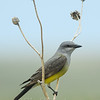 "Western Kingbird © 2016 Nova Mackentley Pawnee Grasslands, CO WEK  <div class=""ss-paypal-button""><div class=""ss-paypal-add-to-cart-section""><div class=""ss-paypal-product-options""><h4>Mat Sizes</h4><ul><li><a href=""https://www.paypal.com/cgi-bin/webscr?cmd=_cart&business=T77V5VKCW4K2U&lc=US&item_name=Western%20Kingbird%20%C2%A9%202016%20Nova%20Mackentley%20Pawnee%20Grasslands%2C%20CO%20WEK&item_number=http%3A%2F%2Fwww.nightflightimages.com%2FGalleries-1%2FTravels%2Fi-pjsjcwH&button_subtype=products&no_note=0&cn=Add%20special%20instructions%20to%20the%20seller%3A&no_shipping=2&currency_code=USD&weight_unit=lbs&add=1&bn=PP-ShopCartBF%3Abtn_cart_SM.gif%3ANonHosted&on0=Mat%20Sizes&option_select0=5%20x%207&option_amount0=10.00&option_select1=8%20x%2010&option_amount1=18.00&option_select2=11%20x%2014&option_amount2=28.00&option_select3=card&option_amount3=4.00&option_index=0&charset=utf-8&submit=&os0=5%20x%207"" target=""paypal""><span>5 x 7 $11.00 USD</span><img src=""https://www.paypalobjects.com/en_US/i/btn/btn_cart_SM.gif""></a></li><li><a href=""https://www.paypal.com/cgi-bin/webscr?cmd=_cart&business=T77V5VKCW4K2U&lc=US&item_name=Western%20Kingbird%20%C2%A9%202016%20Nova%20Mackentley%20Pawnee%20Grasslands%2C%20CO%20WEK&item_number=http%3A%2F%2Fwww.nightflightimages.com%2FGalleries-1%2FTravels%2Fi-pjsjcwH&button_subtype=products&no_note=0&cn=Add%20special%20instructions%20to%20the%20seller%3A&no_shipping=2&currency_code=USD&weight_unit=lbs&add=1&bn=PP-ShopCartBF%3Abtn_cart_SM.gif%3ANonHosted&on0=Mat%20Sizes&option_select0=5%20x%207&option_amount0=10.00&option_select1=8%20x%2010&option_amount1=18.00&option_select2=11%20x%2014&option_amount2=28.00&option_select3=card&option_amount3=4.00&option_index=0&charset=utf-8&submit=&os0=8%20x%2010"" target=""paypal""><span>8 x 10 $19.00 USD</span><img src=""https://www.paypalobjects.com/en_US/i/btn/btn_cart_SM.gif""></a></li><li><a href=""https://www.paypal.com/cgi-bin/webscr?cmd=_cart&business=T77V5VKCW4K2U&lc=US&item_name=Western%20Kingbird%20%C2%A9%202016%20Nova%20Mackentley%20Pawnee%20Grasslands%2C%20CO%20WEK&item_number=http%3A%2F%2Fwww.nightflightimages.com%2FGalleries-1%2FTravels%2Fi-pjsjcwH&button_subtype=products&no_note=0&cn=Add%20special%20instructions%20to%20the%20seller%3A&no_shipping=2&currency_code=USD&weight_unit=lbs&add=1&bn=PP-ShopCartBF%3Abtn_cart_SM.gif%3ANonHosted&on0=Mat%20Sizes&option_select0=5%20x%207&option_amount0=10.00&option_select1=8%20x%2010&option_amount1=18.00&option_select2=11%20x%2014&option_amount2=28.00&option_select3=card&option_amount3=4.00&option_index=0&charset=utf-8&submit=&os0=11%20x%2014"" target=""paypal""><span>11 x 14 $29.00 USD</span><img src=""https://www.paypalobjects.com/en_US/i/btn/btn_cart_SM.gif""></a></li><li><a href=""https://www.paypal.com/cgi-bin/webscr?cmd=_cart&business=T77V5VKCW4K2U&lc=US&item_name=Western%20Kingbird%20%C2%A9%202016%20Nova%20Mackentley%20Pawnee%20Grasslands%2C%20CO%20WEK&item_number=http%3A%2F%2Fwww.nightflightimages.com%2FGalleries-1%2FTravels%2Fi-pjsjcwH&button_subtype=products&no_note=0&cn=Add%20special%20instructions%20to%20the%20seller%3A&no_shipping=2&currency_code=USD&weight_unit=lbs&add=1&bn=PP-ShopCartBF%3Abtn_cart_SM.gif%3ANonHosted&on0=Mat%20Sizes&option_select0=5%20x%207&option_amount0=10.00&option_select1=8%20x%2010&option_amount1=18.00&option_select2=11%20x%2014&option_amount2=28.00&option_select3=card&option_amount3=4.00&option_index=0&charset=utf-8&submit=&os0=card"" target=""paypal""><span>card $5.00 USD</span><img src=""https://www.paypalobjects.com/en_US/i/btn/btn_cart_SM.gif""></a></li></ul></div></div> <div class=""ss-paypal-view-cart-section""><a href=""https://www.paypal.com/cgi-bin/webscr?cmd=_cart&business=T77V5VKCW4K2U&display=1&item_name=Western%20Kingbird%20%C2%A9%202016%20Nova%20Mackentley%20Pawnee%20Grasslands%2C%20CO%20WEK&item_number=http%3A%2F%2Fwww.nightflightimages.com%2FGalleries-1%2FTravels%2Fi-pjsjcwH&charset=utf-8&submit="" target=""paypal"" class=""ss-paypal-submit-button""><img src=""https://www.paypalobjects.com/en_US/i/btn/btn_viewcart_LG.gif""></a></div></div><div class=""ss-paypal-button-end""></div>"