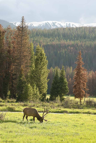 "Elk with mountains © 2009 Nova Mackentley Rocky Mountain National Park, CO EWM  <div class=""ss-paypal-button""><div class=""ss-paypal-add-to-cart-section""><div class=""ss-paypal-product-options""><h4>Mat Sizes</h4><ul><li><a href=""https://www.paypal.com/cgi-bin/webscr?cmd=_cart&amp;business=T77V5VKCW4K2U&amp;lc=US&amp;item_name=Elk%20with%20mountains%20%C2%A9%202009%20Nova%20Mackentley%20Rocky%20Mountain%20National%20Park%2C%20CO%20EWM&amp;item_number=http%3A%2F%2Fwww.nightflightimages.com%2FGalleries-1%2FTravels%2Fi-rP29Tcm&amp;button_subtype=products&amp;no_note=0&amp;cn=Add%20special%20instructions%20to%20the%20seller%3A&amp;no_shipping=2&amp;currency_code=USD&amp;weight_unit=lbs&amp;add=1&amp;bn=PP-ShopCartBF%3Abtn_cart_SM.gif%3ANonHosted&amp;on0=Mat%20Sizes&amp;option_select0=5%20x%207&amp;option_amount0=10.00&amp;option_select1=8%20x%2010&amp;option_amount1=18.00&amp;option_select2=11%20x%2014&amp;option_amount2=28.00&amp;option_select3=card&amp;option_amount3=4.00&amp;option_index=0&amp;charset=utf-8&amp;submit=&amp;os0=5%20x%207"" target=""paypal""><span>5 x 7 $11.00 USD</span><img src=""https://www.paypalobjects.com/en_US/i/btn/btn_cart_SM.gif""></a></li><li><a href=""https://www.paypal.com/cgi-bin/webscr?cmd=_cart&amp;business=T77V5VKCW4K2U&amp;lc=US&amp;item_name=Elk%20with%20mountains%20%C2%A9%202009%20Nova%20Mackentley%20Rocky%20Mountain%20National%20Park%2C%20CO%20EWM&amp;item_number=http%3A%2F%2Fwww.nightflightimages.com%2FGalleries-1%2FTravels%2Fi-rP29Tcm&amp;button_subtype=products&amp;no_note=0&amp;cn=Add%20special%20instructions%20to%20the%20seller%3A&amp;no_shipping=2&amp;currency_code=USD&amp;weight_unit=lbs&amp;add=1&amp;bn=PP-ShopCartBF%3Abtn_cart_SM.gif%3ANonHosted&amp;on0=Mat%20Sizes&amp;option_select0=5%20x%207&amp;option_amount0=10.00&amp;option_select1=8%20x%2010&amp;option_amount1=18.00&amp;option_select2=11%20x%2014&amp;option_amount2=28.00&amp;option_select3=card&amp;option_amount3=4.00&amp;option_index=0&amp;charset=utf-8&amp;submit=&amp;os0=8%20x%2010"" target=""paypal""><span>8 x 10 $19.00 USD</span><img src=""https://www.paypalobjects.com/en_US/i/btn/btn_cart_SM.gif""></a></li><li><a href=""https://www.paypal.com/cgi-bin/webscr?cmd=_cart&amp;business=T77V5VKCW4K2U&amp;lc=US&amp;item_name=Elk%20with%20mountains%20%C2%A9%202009%20Nova%20Mackentley%20Rocky%20Mountain%20National%20Park%2C%20CO%20EWM&amp;item_number=http%3A%2F%2Fwww.nightflightimages.com%2FGalleries-1%2FTravels%2Fi-rP29Tcm&amp;button_subtype=products&amp;no_note=0&amp;cn=Add%20special%20instructions%20to%20the%20seller%3A&amp;no_shipping=2&amp;currency_code=USD&amp;weight_unit=lbs&amp;add=1&amp;bn=PP-ShopCartBF%3Abtn_cart_SM.gif%3ANonHosted&amp;on0=Mat%20Sizes&amp;option_select0=5%20x%207&amp;option_amount0=10.00&amp;option_select1=8%20x%2010&amp;option_amount1=18.00&amp;option_select2=11%20x%2014&amp;option_amount2=28.00&amp;option_select3=card&amp;option_amount3=4.00&amp;option_index=0&amp;charset=utf-8&amp;submit=&amp;os0=11%20x%2014"" target=""paypal""><span>11 x 14 $29.00 USD</span><img src=""https://www.paypalobjects.com/en_US/i/btn/btn_cart_SM.gif""></a></li><li><a href=""https://www.paypal.com/cgi-bin/webscr?cmd=_cart&amp;business=T77V5VKCW4K2U&amp;lc=US&amp;item_name=Elk%20with%20mountains%20%C2%A9%202009%20Nova%20Mackentley%20Rocky%20Mountain%20National%20Park%2C%20CO%20EWM&amp;item_number=http%3A%2F%2Fwww.nightflightimages.com%2FGalleries-1%2FTravels%2Fi-rP29Tcm&amp;button_subtype=products&amp;no_note=0&amp;cn=Add%20special%20instructions%20to%20the%20seller%3A&amp;no_shipping=2&amp;currency_code=USD&amp;weight_unit=lbs&amp;add=1&amp;bn=PP-ShopCartBF%3Abtn_cart_SM.gif%3ANonHosted&amp;on0=Mat%20Sizes&amp;option_select0=5%20x%207&amp;option_amount0=10.00&amp;option_select1=8%20x%2010&amp;option_amount1=18.00&amp;option_select2=11%20x%2014&amp;option_amount2=28.00&amp;option_select3=card&amp;option_amount3=4.00&amp;option_index=0&amp;charset=utf-8&amp;submit=&amp;os0=card"" target=""paypal""><span>card $5.00 USD</span><img src=""https://www.paypalobjects.com/en_US/i/btn/btn_cart_SM.gif""></a></li></ul></div></div> <div class=""ss-paypal-view-cart-section""><a href=""https://www.paypal.com/cgi-bin/webscr?cmd=_cart&amp;business=T77V5VKCW4K2U&amp;display=1&amp;item_name=Elk%20with%20mountains%20%C2%A9%202009%20Nova%20Mackentley%20Rocky%20Mountain%20National%20Park%2C%20CO%20EWM&amp;item_number=http%3A%2F%2Fwww.nightflightimages.com%2FGalleries-1%2FTravels%2Fi-rP29Tcm&amp;charset=utf-8&amp;submit="" target=""paypal"" class=""ss-paypal-submit-button""><img src=""https://www.paypalobjects.com/en_US/i/btn/btn_viewcart_LG.gif""></a></div></div><div class=""ss-paypal-button-end""></div>"