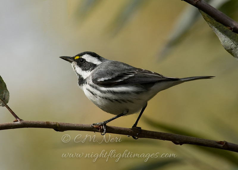 "Black-throated Gray Warbler © 2010 C. M. Neri. Clear Lake State Park, CA BTYW  <div class=""ss-paypal-button""><div class=""ss-paypal-add-to-cart-section""><div class=""ss-paypal-product-options""><h4>Mat Sizes</h4><ul><li><a href=""https://www.paypal.com/cgi-bin/webscr?cmd=_cart&amp;business=T77V5VKCW4K2U&amp;lc=US&amp;item_name=Black-throated%20Gray%20Warbler%20%C2%A9%202010%20C.%20M.%20Neri.%20Clear%20Lake%20State%20Park%2C%20CA%20BTYW&amp;item_number=http%3A%2F%2Fwww.nightflightimages.com%2FGalleries-1%2FTravels%2Fi-rQGqQ5r&amp;button_subtype=products&amp;no_note=0&amp;cn=Add%20special%20instructions%20to%20the%20seller%3A&amp;no_shipping=2&amp;currency_code=USD&amp;weight_unit=lbs&amp;add=1&amp;bn=PP-ShopCartBF%3Abtn_cart_SM.gif%3ANonHosted&amp;on0=Mat%20Sizes&amp;option_select0=5%20x%207&amp;option_amount0=10.00&amp;option_select1=8%20x%2010&amp;option_amount1=18.00&amp;option_select2=11%20x%2014&amp;option_amount2=28.00&amp;option_select3=card&amp;option_amount3=4.00&amp;option_index=0&amp;charset=utf-8&amp;submit=&amp;os0=5%20x%207"" target=""paypal""><span>5 x 7 $11.00 USD</span><img src=""https://www.paypalobjects.com/en_US/i/btn/btn_cart_SM.gif""></a></li><li><a href=""https://www.paypal.com/cgi-bin/webscr?cmd=_cart&amp;business=T77V5VKCW4K2U&amp;lc=US&amp;item_name=Black-throated%20Gray%20Warbler%20%C2%A9%202010%20C.%20M.%20Neri.%20Clear%20Lake%20State%20Park%2C%20CA%20BTYW&amp;item_number=http%3A%2F%2Fwww.nightflightimages.com%2FGalleries-1%2FTravels%2Fi-rQGqQ5r&amp;button_subtype=products&amp;no_note=0&amp;cn=Add%20special%20instructions%20to%20the%20seller%3A&amp;no_shipping=2&amp;currency_code=USD&amp;weight_unit=lbs&amp;add=1&amp;bn=PP-ShopCartBF%3Abtn_cart_SM.gif%3ANonHosted&amp;on0=Mat%20Sizes&amp;option_select0=5%20x%207&amp;option_amount0=10.00&amp;option_select1=8%20x%2010&amp;option_amount1=18.00&amp;option_select2=11%20x%2014&amp;option_amount2=28.00&amp;option_select3=card&amp;option_amount3=4.00&amp;option_index=0&amp;charset=utf-8&amp;submit=&amp;os0=8%20x%2010"" target=""paypal""><span>8 x 10 $19.00 USD</span><img src=""https://www.paypalobjects.com/en_US/i/btn/btn_cart_SM.gif""></a></li><li><a href=""https://www.paypal.com/cgi-bin/webscr?cmd=_cart&amp;business=T77V5VKCW4K2U&amp;lc=US&amp;item_name=Black-throated%20Gray%20Warbler%20%C2%A9%202010%20C.%20M.%20Neri.%20Clear%20Lake%20State%20Park%2C%20CA%20BTYW&amp;item_number=http%3A%2F%2Fwww.nightflightimages.com%2FGalleries-1%2FTravels%2Fi-rQGqQ5r&amp;button_subtype=products&amp;no_note=0&amp;cn=Add%20special%20instructions%20to%20the%20seller%3A&amp;no_shipping=2&amp;currency_code=USD&amp;weight_unit=lbs&amp;add=1&amp;bn=PP-ShopCartBF%3Abtn_cart_SM.gif%3ANonHosted&amp;on0=Mat%20Sizes&amp;option_select0=5%20x%207&amp;option_amount0=10.00&amp;option_select1=8%20x%2010&amp;option_amount1=18.00&amp;option_select2=11%20x%2014&amp;option_amount2=28.00&amp;option_select3=card&amp;option_amount3=4.00&amp;option_index=0&amp;charset=utf-8&amp;submit=&amp;os0=11%20x%2014"" target=""paypal""><span>11 x 14 $29.00 USD</span><img src=""https://www.paypalobjects.com/en_US/i/btn/btn_cart_SM.gif""></a></li><li><a href=""https://www.paypal.com/cgi-bin/webscr?cmd=_cart&amp;business=T77V5VKCW4K2U&amp;lc=US&amp;item_name=Black-throated%20Gray%20Warbler%20%C2%A9%202010%20C.%20M.%20Neri.%20Clear%20Lake%20State%20Park%2C%20CA%20BTYW&amp;item_number=http%3A%2F%2Fwww.nightflightimages.com%2FGalleries-1%2FTravels%2Fi-rQGqQ5r&amp;button_subtype=products&amp;no_note=0&amp;cn=Add%20special%20instructions%20to%20the%20seller%3A&amp;no_shipping=2&amp;currency_code=USD&amp;weight_unit=lbs&amp;add=1&amp;bn=PP-ShopCartBF%3Abtn_cart_SM.gif%3ANonHosted&amp;on0=Mat%20Sizes&amp;option_select0=5%20x%207&amp;option_amount0=10.00&amp;option_select1=8%20x%2010&amp;option_amount1=18.00&amp;option_select2=11%20x%2014&amp;option_amount2=28.00&amp;option_select3=card&amp;option_amount3=4.00&amp;option_index=0&amp;charset=utf-8&amp;submit=&amp;os0=card"" target=""paypal""><span>card $5.00 USD</span><img src=""https://www.paypalobjects.com/en_US/i/btn/btn_cart_SM.gif""></a></li></ul></div></div> <div class=""ss-paypal-view-cart-section""><a href=""https://www.paypal.com/cgi-bin/webscr?cmd=_cart&amp;business=T77V5VKCW4K2U&amp;display=1&amp;item_name=Black-throated%20Gray%20Warbler%20%C2%A9%202010%20C.%20M.%20Neri.%20Clear%20Lake%20State%20Park%2C%20CA%20BTYW&amp;item_number=http%3A%2F%2Fwww.nightflightimages.com%2FGalleries-1%2FTravels%2Fi-rQGqQ5r&amp;charset=utf-8&amp;submit="" target=""paypal"" class=""ss-paypal-submit-button""><img src=""https://www.paypalobjects.com/en_US/i/btn/btn_viewcart_LG.gif""></a></div></div><div class=""ss-paypal-button-end""></div>"