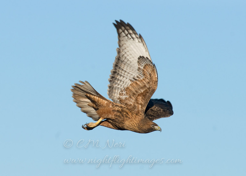 """Red-tailed Hawk © 2010 C. M. Neri Bosque Del Apache, NM RTHANM  <div class=""""ss-paypal-button""""><div class=""""ss-paypal-add-to-cart-section""""><div class=""""ss-paypal-product-options""""><h4>Mat Sizes</h4><ul><li><a href=""""https://www.paypal.com/cgi-bin/webscr?cmd=_cart&amp;business=T77V5VKCW4K2U&amp;lc=US&amp;item_name=Red-tailed%20Hawk%20%C2%A9%202010%20C.%20M.%20Neri%20Bosque%20Del%20Apache%2C%20NM%20RTHANM&amp;item_number=http%3A%2F%2Fwww.nightflightimages.com%2FGalleries-1%2FTravels%2Fi-snVMrgx&amp;button_subtype=products&amp;no_note=0&amp;cn=Add%20special%20instructions%20to%20the%20seller%3A&amp;no_shipping=2&amp;currency_code=USD&amp;weight_unit=lbs&amp;add=1&amp;bn=PP-ShopCartBF%3Abtn_cart_SM.gif%3ANonHosted&amp;on0=Mat%20Sizes&amp;option_select0=5%20x%207&amp;option_amount0=10.00&amp;option_select1=8%20x%2010&amp;option_amount1=18.00&amp;option_select2=11%20x%2014&amp;option_amount2=28.00&amp;option_select3=card&amp;option_amount3=4.00&amp;option_index=0&amp;charset=utf-8&amp;submit=&amp;os0=5%20x%207"""" target=""""paypal""""><span>5 x 7 $11.00 USD</span><img src=""""https://www.paypalobjects.com/en_US/i/btn/btn_cart_SM.gif""""></a></li><li><a href=""""https://www.paypal.com/cgi-bin/webscr?cmd=_cart&amp;business=T77V5VKCW4K2U&amp;lc=US&amp;item_name=Red-tailed%20Hawk%20%C2%A9%202010%20C.%20M.%20Neri%20Bosque%20Del%20Apache%2C%20NM%20RTHANM&amp;item_number=http%3A%2F%2Fwww.nightflightimages.com%2FGalleries-1%2FTravels%2Fi-snVMrgx&amp;button_subtype=products&amp;no_note=0&amp;cn=Add%20special%20instructions%20to%20the%20seller%3A&amp;no_shipping=2&amp;currency_code=USD&amp;weight_unit=lbs&amp;add=1&amp;bn=PP-ShopCartBF%3Abtn_cart_SM.gif%3ANonHosted&amp;on0=Mat%20Sizes&amp;option_select0=5%20x%207&amp;option_amount0=10.00&amp;option_select1=8%20x%2010&amp;option_amount1=18.00&amp;option_select2=11%20x%2014&amp;option_amount2=28.00&amp;option_select3=card&amp;option_amount3=4.00&amp;option_index=0&amp;charset=utf-8&amp;submit=&amp;os0=8%20x%2010"""" target=""""paypal""""><span>8 x 10 $19.00 USD</s"""