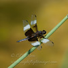 "Eight-spotted Skimmer  © 2012 C. M. Neri Zeeland, MI 8SPS  <div class=""ss-paypal-button""><div class=""ss-paypal-add-to-cart-section""><div class=""ss-paypal-product-options""><h4>Mat Sizes</h4><ul><li><a href=""https://www.paypal.com/cgi-bin/webscr?cmd=_cart&amp;business=T77V5VKCW4K2U&amp;lc=US&amp;item_name=Eight-spotted%20Skimmer%20%20%C2%A9%202012%20C.%20M.%20Neri%20Zeeland%2C%20MI%208SPS&amp;item_number=http%3A%2F%2Fwww.nightflightimages.com%2FGalleries-1%2FTravels%2Fi-v7gcrvZ&amp;button_subtype=products&amp;no_note=0&amp;cn=Add%20special%20instructions%20to%20the%20seller%3A&amp;no_shipping=2&amp;currency_code=USD&amp;weight_unit=lbs&amp;add=1&amp;bn=PP-ShopCartBF%3Abtn_cart_SM.gif%3ANonHosted&amp;on0=Mat%20Sizes&amp;option_select0=5%20x%207&amp;option_amount0=10.00&amp;option_select1=8%20x%2010&amp;option_amount1=18.00&amp;option_select2=11%20x%2014&amp;option_amount2=28.00&amp;option_select3=card&amp;option_amount3=4.00&amp;option_index=0&amp;charset=utf-8&amp;submit=&amp;os0=5%20x%207"" target=""paypal""><span>5 x 7 $11.00 USD</span><img src=""https://www.paypalobjects.com/en_US/i/btn/btn_cart_SM.gif""></a></li><li><a href=""https://www.paypal.com/cgi-bin/webscr?cmd=_cart&amp;business=T77V5VKCW4K2U&amp;lc=US&amp;item_name=Eight-spotted%20Skimmer%20%20%C2%A9%202012%20C.%20M.%20Neri%20Zeeland%2C%20MI%208SPS&amp;item_number=http%3A%2F%2Fwww.nightflightimages.com%2FGalleries-1%2FTravels%2Fi-v7gcrvZ&amp;button_subtype=products&amp;no_note=0&amp;cn=Add%20special%20instructions%20to%20the%20seller%3A&amp;no_shipping=2&amp;currency_code=USD&amp;weight_unit=lbs&amp;add=1&amp;bn=PP-ShopCartBF%3Abtn_cart_SM.gif%3ANonHosted&amp;on0=Mat%20Sizes&amp;option_select0=5%20x%207&amp;option_amount0=10.00&amp;option_select1=8%20x%2010&amp;option_amount1=18.00&amp;option_select2=11%20x%2014&amp;option_amount2=28.00&amp;option_select3=card&amp;option_amount3=4.00&amp;option_index=0&amp;charset=utf-8&amp;submit=&amp;os0=8%20x%2010"" target=""paypal""><span>8 x 10 $19.00 USD</span><img src=""https://www.paypalobjects.com/en_US/i/btn/btn_cart_SM.gif""></a></li><li><a href=""https://www.paypal.com/cgi-bin/webscr?cmd=_cart&amp;business=T77V5VKCW4K2U&amp;lc=US&amp;item_name=Eight-spotted%20Skimmer%20%20%C2%A9%202012%20C.%20M.%20Neri%20Zeeland%2C%20MI%208SPS&amp;item_number=http%3A%2F%2Fwww.nightflightimages.com%2FGalleries-1%2FTravels%2Fi-v7gcrvZ&amp;button_subtype=products&amp;no_note=0&amp;cn=Add%20special%20instructions%20to%20the%20seller%3A&amp;no_shipping=2&amp;currency_code=USD&amp;weight_unit=lbs&amp;add=1&amp;bn=PP-ShopCartBF%3Abtn_cart_SM.gif%3ANonHosted&amp;on0=Mat%20Sizes&amp;option_select0=5%20x%207&amp;option_amount0=10.00&amp;option_select1=8%20x%2010&amp;option_amount1=18.00&amp;option_select2=11%20x%2014&amp;option_amount2=28.00&amp;option_select3=card&amp;option_amount3=4.00&amp;option_index=0&amp;charset=utf-8&amp;submit=&amp;os0=11%20x%2014"" target=""paypal""><span>11 x 14 $29.00 USD</span><img src=""https://www.paypalobjects.com/en_US/i/btn/btn_cart_SM.gif""></a></li><li><a href=""https://www.paypal.com/cgi-bin/webscr?cmd=_cart&amp;business=T77V5VKCW4K2U&amp;lc=US&amp;item_name=Eight-spotted%20Skimmer%20%20%C2%A9%202012%20C.%20M.%20Neri%20Zeeland%2C%20MI%208SPS&amp;item_number=http%3A%2F%2Fwww.nightflightimages.com%2FGalleries-1%2FTravels%2Fi-v7gcrvZ&amp;button_subtype=products&amp;no_note=0&amp;cn=Add%20special%20instructions%20to%20the%20seller%3A&amp;no_shipping=2&amp;currency_code=USD&amp;weight_unit=lbs&amp;add=1&amp;bn=PP-ShopCartBF%3Abtn_cart_SM.gif%3ANonHosted&amp;on0=Mat%20Sizes&amp;option_select0=5%20x%207&amp;option_amount0=10.00&amp;option_select1=8%20x%2010&amp;option_amount1=18.00&amp;option_select2=11%20x%2014&amp;option_amount2=28.00&amp;option_select3=card&amp;option_amount3=4.00&amp;option_index=0&amp;charset=utf-8&amp;submit=&amp;os0=card"" target=""paypal""><span>card $5.00 USD</span><img src=""https://www.paypalobjects.com/en_US/i/btn/btn_cart_SM.gif""></a></li></ul></div></div> <div class=""ss-paypal-view-cart-section""><a href=""https://www.paypal.com/cgi-bin/webscr?cmd=_cart&amp;business=T77V5VKCW4K2U&amp;display=1&amp;item_name=Eight-spotted%20Skimmer%20%20%C2%A9%202012%20C.%20M.%20Neri%20Zeeland%2C%20MI%208SPS&amp;item_number=http%3A%2F%2Fwww.nightflightimages.com%2FGalleries-1%2FTravels%2Fi-v7gcrvZ&amp;charset=utf-8&amp;submit="" target=""paypal"" class=""ss-paypal-submit-button""><img src=""https://www.paypalobjects.com/en_US/i/btn/btn_viewcart_LG.gif""></a></div></div><div class=""ss-paypal-button-end""></div>"