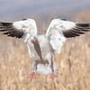 "Snow Goose landing 2 © 2010 Nova Mackentley Bosque del Apache NWR, NM SGW2  <div class=""ss-paypal-button""><div class=""ss-paypal-add-to-cart-section""><div class=""ss-paypal-product-options""><h4>Mat Sizes</h4><ul><li><a href=""https://www.paypal.com/cgi-bin/webscr?cmd=_cart&business=T77V5VKCW4K2U&lc=US&item_name=Snow%20Goose%20landing%202%20%C2%A9%202010%20Nova%20Mackentley%20Bosque%20del%20Apache%20NWR%2C%20NM%20SGW2&item_number=http%3A%2F%2Fwww.nightflightimages.com%2FGalleries-1%2FTravels%2Fi-zXFkjf7&button_subtype=products&no_note=0&cn=Add%20special%20instructions%20to%20the%20seller%3A&no_shipping=2&currency_code=USD&weight_unit=lbs&add=1&bn=PP-ShopCartBF%3Abtn_cart_SM.gif%3ANonHosted&on0=Mat%20Sizes&option_select0=5%20x%207&option_amount0=10.00&option_select1=8%20x%2010&option_amount1=18.00&option_select2=11%20x%2014&option_amount2=28.00&option_select3=card&option_amount3=4.00&option_index=0&charset=utf-8&submit=&os0=5%20x%207"" target=""paypal""><span>5 x 7 $11.00 USD</span><img src=""https://www.paypalobjects.com/en_US/i/btn/btn_cart_SM.gif""></a></li><li><a href=""https://www.paypal.com/cgi-bin/webscr?cmd=_cart&business=T77V5VKCW4K2U&lc=US&item_name=Snow%20Goose%20landing%202%20%C2%A9%202010%20Nova%20Mackentley%20Bosque%20del%20Apache%20NWR%2C%20NM%20SGW2&item_number=http%3A%2F%2Fwww.nightflightimages.com%2FGalleries-1%2FTravels%2Fi-zXFkjf7&button_subtype=products&no_note=0&cn=Add%20special%20instructions%20to%20the%20seller%3A&no_shipping=2&currency_code=USD&weight_unit=lbs&add=1&bn=PP-ShopCartBF%3Abtn_cart_SM.gif%3ANonHosted&on0=Mat%20Sizes&option_select0=5%20x%207&option_amount0=10.00&option_select1=8%20x%2010&option_amount1=18.00&option_select2=11%20x%2014&option_amount2=28.00&option_select3=card&option_amount3=4.00&option_index=0&charset=utf-8&submit=&os0=8%20x%2010"" target=""paypal""><span>8 x 10 $19.00 USD</span><img src=""https://www.paypalobjects.com/en_US/i/btn/btn_cart_SM.gif""></a></li><li><a href=""https://www.paypal.com/cgi-bin/webscr?cmd=_cart&business=T77V5VKCW4K2U&lc=US&item_name=Snow%20Goose%20landing%202%20%C2%A9%202010%20Nova%20Mackentley%20Bosque%20del%20Apache%20NWR%2C%20NM%20SGW2&item_number=http%3A%2F%2Fwww.nightflightimages.com%2FGalleries-1%2FTravels%2Fi-zXFkjf7&button_subtype=products&no_note=0&cn=Add%20special%20instructions%20to%20the%20seller%3A&no_shipping=2&currency_code=USD&weight_unit=lbs&add=1&bn=PP-ShopCartBF%3Abtn_cart_SM.gif%3ANonHosted&on0=Mat%20Sizes&option_select0=5%20x%207&option_amount0=10.00&option_select1=8%20x%2010&option_amount1=18.00&option_select2=11%20x%2014&option_amount2=28.00&option_select3=card&option_amount3=4.00&option_index=0&charset=utf-8&submit=&os0=11%20x%2014"" target=""paypal""><span>11 x 14 $29.00 USD</span><img src=""https://www.paypalobjects.com/en_US/i/btn/btn_cart_SM.gif""></a></li><li><a href=""https://www.paypal.com/cgi-bin/webscr?cmd=_cart&business=T77V5VKCW4K2U&lc=US&item_name=Snow%20Goose%20landing%202%20%C2%A9%202010%20Nova%20Mackentley%20Bosque%20del%20Apache%20NWR%2C%20NM%20SGW2&item_number=http%3A%2F%2Fwww.nightflightimages.com%2FGalleries-1%2FTravels%2Fi-zXFkjf7&button_subtype=products&no_note=0&cn=Add%20special%20instructions%20to%20the%20seller%3A&no_shipping=2&currency_code=USD&weight_unit=lbs&add=1&bn=PP-ShopCartBF%3Abtn_cart_SM.gif%3ANonHosted&on0=Mat%20Sizes&option_select0=5%20x%207&option_amount0=10.00&option_select1=8%20x%2010&option_amount1=18.00&option_select2=11%20x%2014&option_amount2=28.00&option_select3=card&option_amount3=4.00&option_index=0&charset=utf-8&submit=&os0=card"" target=""paypal""><span>card $5.00 USD</span><img src=""https://www.paypalobjects.com/en_US/i/btn/btn_cart_SM.gif""></a></li></ul></div></div> <div class=""ss-paypal-view-cart-section""><a href=""https://www.paypal.com/cgi-bin/webscr?cmd=_cart&business=T77V5VKCW4K2U&display=1&item_name=Snow%20Goose%20landing%202%20%C2%A9%202010%20Nova%20Mackentley%20Bosque%20del%20Apache%20NWR%2C%20NM%20SGW2&item_number=http%3A%2F%2Fwww.nightflightimages.com%2FGalleries-1%2FTravels%2Fi-zXFkjf7&charset=utf-8&submit="" target=""paypal"" class=""ss-paypal-submit-button""><img src=""https://www.paypalobjects.com/en_US/i/btn/btn_viewcart_LG.gif""></a></div></div><div class=""ss-paypal-button-end""></div>"