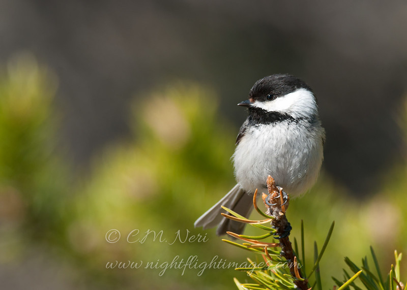 "Black-capped Chickadee © 2013 C. M. Neri Whitefish Point, MI BCCH  <div class=""ss-paypal-button""><div class=""ss-paypal-add-to-cart-section""><div class=""ss-paypal-product-options""><h4>Mat Sizes</h4><ul><li><a href=""https://www.paypal.com/cgi-bin/webscr?cmd=_cart&amp;business=T77V5VKCW4K2U&amp;lc=US&amp;item_name=Black-capped%20Chickadee%20%C2%A9%202013%20C.%20M.%20Neri%20Whitefish%20Point%2C%20MI%20BCCH&amp;item_number=http%3A%2F%2Fwww.nightflightimages.com%2FGalleries-1%2FUpper-Peninsula-of-MI%2Fi-3tBnJmR&amp;button_subtype=products&amp;no_note=0&amp;cn=Add%20special%20instructions%20to%20the%20seller%3A&amp;no_shipping=2&amp;currency_code=USD&amp;weight_unit=lbs&amp;add=1&amp;bn=PP-ShopCartBF%3Abtn_cart_SM.gif%3ANonHosted&amp;on0=Mat%20Sizes&amp;option_select0=5%20x%207&amp;option_amount0=10.00&amp;option_select1=8%20x%2010&amp;option_amount1=18.00&amp;option_select2=11%20x%2014&amp;option_amount2=28.00&amp;option_select3=card&amp;option_amount3=4.00&amp;option_index=0&amp;charset=utf-8&amp;submit=&amp;os0=5%20x%207"" target=""paypal""><span>5 x 7 $11.00 USD</span><img src=""https://www.paypalobjects.com/en_US/i/btn/btn_cart_SM.gif""></a></li><li><a href=""https://www.paypal.com/cgi-bin/webscr?cmd=_cart&amp;business=T77V5VKCW4K2U&amp;lc=US&amp;item_name=Black-capped%20Chickadee%20%C2%A9%202013%20C.%20M.%20Neri%20Whitefish%20Point%2C%20MI%20BCCH&amp;item_number=http%3A%2F%2Fwww.nightflightimages.com%2FGalleries-1%2FUpper-Peninsula-of-MI%2Fi-3tBnJmR&amp;button_subtype=products&amp;no_note=0&amp;cn=Add%20special%20instructions%20to%20the%20seller%3A&amp;no_shipping=2&amp;currency_code=USD&amp;weight_unit=lbs&amp;add=1&amp;bn=PP-ShopCartBF%3Abtn_cart_SM.gif%3ANonHosted&amp;on0=Mat%20Sizes&amp;option_select0=5%20x%207&amp;option_amount0=10.00&amp;option_select1=8%20x%2010&amp;option_amount1=18.00&amp;option_select2=11%20x%2014&amp;option_amount2=28.00&amp;option_select3=card&amp;option_amount3=4.00&amp;option_index=0&amp;charset=utf-8&amp;submit=&amp;os0=8%20x%2010"" target=""paypal""><span>8 x 10 $19.00 USD</span><img src=""https://www.paypalobjects.com/en_US/i/btn/btn_cart_SM.gif""></a></li><li><a href=""https://www.paypal.com/cgi-bin/webscr?cmd=_cart&amp;business=T77V5VKCW4K2U&amp;lc=US&amp;item_name=Black-capped%20Chickadee%20%C2%A9%202013%20C.%20M.%20Neri%20Whitefish%20Point%2C%20MI%20BCCH&amp;item_number=http%3A%2F%2Fwww.nightflightimages.com%2FGalleries-1%2FUpper-Peninsula-of-MI%2Fi-3tBnJmR&amp;button_subtype=products&amp;no_note=0&amp;cn=Add%20special%20instructions%20to%20the%20seller%3A&amp;no_shipping=2&amp;currency_code=USD&amp;weight_unit=lbs&amp;add=1&amp;bn=PP-ShopCartBF%3Abtn_cart_SM.gif%3ANonHosted&amp;on0=Mat%20Sizes&amp;option_select0=5%20x%207&amp;option_amount0=10.00&amp;option_select1=8%20x%2010&amp;option_amount1=18.00&amp;option_select2=11%20x%2014&amp;option_amount2=28.00&amp;option_select3=card&amp;option_amount3=4.00&amp;option_index=0&amp;charset=utf-8&amp;submit=&amp;os0=11%20x%2014"" target=""paypal""><span>11 x 14 $29.00 USD</span><img src=""https://www.paypalobjects.com/en_US/i/btn/btn_cart_SM.gif""></a></li><li><a href=""https://www.paypal.com/cgi-bin/webscr?cmd=_cart&amp;business=T77V5VKCW4K2U&amp;lc=US&amp;item_name=Black-capped%20Chickadee%20%C2%A9%202013%20C.%20M.%20Neri%20Whitefish%20Point%2C%20MI%20BCCH&amp;item_number=http%3A%2F%2Fwww.nightflightimages.com%2FGalleries-1%2FUpper-Peninsula-of-MI%2Fi-3tBnJmR&amp;button_subtype=products&amp;no_note=0&amp;cn=Add%20special%20instructions%20to%20the%20seller%3A&amp;no_shipping=2&amp;currency_code=USD&amp;weight_unit=lbs&amp;add=1&amp;bn=PP-ShopCartBF%3Abtn_cart_SM.gif%3ANonHosted&amp;on0=Mat%20Sizes&amp;option_select0=5%20x%207&amp;option_amount0=10.00&amp;option_select1=8%20x%2010&amp;option_amount1=18.00&amp;option_select2=11%20x%2014&amp;option_amount2=28.00&amp;option_select3=card&amp;option_amount3=4.00&amp;option_index=0&amp;charset=utf-8&amp;submit=&amp;os0=card"" target=""paypal""><span>card $5.00 USD</span><img src=""https://www.paypalobjects.com/en_US/i/btn/btn_cart_SM.gif""></a></li></ul></div></div> <div class=""ss-paypal-view-cart-section""><a href=""https://www.paypal.com/cgi-bin/webscr?cmd=_cart&amp;business=T77V5VKCW4K2U&amp;display=1&amp;item_name=Black-capped%20Chickadee%20%C2%A9%202013%20C.%20M.%20Neri%20Whitefish%20Point%2C%20MI%20BCCH&amp;item_number=http%3A%2F%2Fwww.nightflightimages.com%2FGalleries-1%2FUpper-Peninsula-of-MI%2Fi-3tBnJmR&amp;charset=utf-8&amp;submit="" target=""paypal"" class=""ss-paypal-submit-button""><img src=""https://www.paypalobjects.com/en_US/i/btn/btn_viewcart_LG.gif""></a></div></div><div class=""ss-paypal-button-end""></div>"