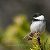 "Black-capped Chickadee © 2013 C. M. Neri Whitefish Point, MI BCCH  <div class=""ss-paypal-button""><div class=""ss-paypal-add-to-cart-section""><div class=""ss-paypal-product-options""><h4>Mat Sizes</h4><ul><li><a href=""https://www.paypal.com/cgi-bin/webscr?cmd=_cart&business=T77V5VKCW4K2U&lc=US&item_name=Black-capped%20Chickadee%20%C2%A9%202013%20C.%20M.%20Neri%20Whitefish%20Point%2C%20MI%20BCCH&item_number=http%3A%2F%2Fwww.nightflightimages.com%2FGalleries-1%2FUpper-Peninsula-of-MI%2Fi-3tBnJmR&button_subtype=products&no_note=0&cn=Add%20special%20instructions%20to%20the%20seller%3A&no_shipping=2&currency_code=USD&weight_unit=lbs&add=1&bn=PP-ShopCartBF%3Abtn_cart_SM.gif%3ANonHosted&on0=Mat%20Sizes&option_select0=5%20x%207&option_amount0=10.00&option_select1=8%20x%2010&option_amount1=18.00&option_select2=11%20x%2014&option_amount2=28.00&option_select3=card&option_amount3=4.00&option_index=0&charset=utf-8&submit=&os0=5%20x%207"" target=""paypal""><span>5 x 7 $11.00 USD</span><img src=""https://www.paypalobjects.com/en_US/i/btn/btn_cart_SM.gif""></a></li><li><a href=""https://www.paypal.com/cgi-bin/webscr?cmd=_cart&business=T77V5VKCW4K2U&lc=US&item_name=Black-capped%20Chickadee%20%C2%A9%202013%20C.%20M.%20Neri%20Whitefish%20Point%2C%20MI%20BCCH&item_number=http%3A%2F%2Fwww.nightflightimages.com%2FGalleries-1%2FUpper-Peninsula-of-MI%2Fi-3tBnJmR&button_subtype=products&no_note=0&cn=Add%20special%20instructions%20to%20the%20seller%3A&no_shipping=2&currency_code=USD&weight_unit=lbs&add=1&bn=PP-ShopCartBF%3Abtn_cart_SM.gif%3ANonHosted&on0=Mat%20Sizes&option_select0=5%20x%207&option_amount0=10.00&option_select1=8%20x%2010&option_amount1=18.00&option_select2=11%20x%2014&option_amount2=28.00&option_select3=card&option_amount3=4.00&option_index=0&charset=utf-8&submit=&os0=8%20x%2010"" target=""paypal""><span>8 x 10 $19.00 USD</span><img src=""https://www.paypalobjects.com/en_US/i/btn/btn_cart_SM.gif""></a></li><li><a href=""https://www.paypal.com/cgi-bin/webscr?cmd=_cart&business=T77V5VKCW4K2U&lc=US&item_name=Black-capped%20Chickadee%20%C2%A9%202013%20C.%20M.%20Neri%20Whitefish%20Point%2C%20MI%20BCCH&item_number=http%3A%2F%2Fwww.nightflightimages.com%2FGalleries-1%2FUpper-Peninsula-of-MI%2Fi-3tBnJmR&button_subtype=products&no_note=0&cn=Add%20special%20instructions%20to%20the%20seller%3A&no_shipping=2&currency_code=USD&weight_unit=lbs&add=1&bn=PP-ShopCartBF%3Abtn_cart_SM.gif%3ANonHosted&on0=Mat%20Sizes&option_select0=5%20x%207&option_amount0=10.00&option_select1=8%20x%2010&option_amount1=18.00&option_select2=11%20x%2014&option_amount2=28.00&option_select3=card&option_amount3=4.00&option_index=0&charset=utf-8&submit=&os0=11%20x%2014"" target=""paypal""><span>11 x 14 $29.00 USD</span><img src=""https://www.paypalobjects.com/en_US/i/btn/btn_cart_SM.gif""></a></li><li><a href=""https://www.paypal.com/cgi-bin/webscr?cmd=_cart&business=T77V5VKCW4K2U&lc=US&item_name=Black-capped%20Chickadee%20%C2%A9%202013%20C.%20M.%20Neri%20Whitefish%20Point%2C%20MI%20BCCH&item_number=http%3A%2F%2Fwww.nightflightimages.com%2FGalleries-1%2FUpper-Peninsula-of-MI%2Fi-3tBnJmR&button_subtype=products&no_note=0&cn=Add%20special%20instructions%20to%20the%20seller%3A&no_shipping=2&currency_code=USD&weight_unit=lbs&add=1&bn=PP-ShopCartBF%3Abtn_cart_SM.gif%3ANonHosted&on0=Mat%20Sizes&option_select0=5%20x%207&option_amount0=10.00&option_select1=8%20x%2010&option_amount1=18.00&option_select2=11%20x%2014&option_amount2=28.00&option_select3=card&option_amount3=4.00&option_index=0&charset=utf-8&submit=&os0=card"" target=""paypal""><span>card $5.00 USD</span><img src=""https://www.paypalobjects.com/en_US/i/btn/btn_cart_SM.gif""></a></li></ul></div></div> <div class=""ss-paypal-view-cart-section""><a href=""https://www.paypal.com/cgi-bin/webscr?cmd=_cart&business=T77V5VKCW4K2U&display=1&item_name=Black-capped%20Chickadee%20%C2%A9%202013%20C.%20M.%20Neri%20Whitefish%20Point%2C%20MI%20BCCH&item_number=http%3A%2F%2Fwww.nightflightimages.com%2FGalleries-1%2FUpper-Peninsula-of-MI%2Fi-3tBnJmR&charset=utf-8&submit="" target=""paypal"" class=""ss-paypal-submit-button""><img src=""https://www.paypalobjects.com/en_US/i/btn/btn_viewcart_LG.gif""></a></div></div><div class=""ss-paypal-button-end""></div>"