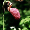 "Pink Ladyslipper © 2004 C. M. Neri Chippewa County, MI PLDYSLP  <div class=""ss-paypal-button""><div class=""ss-paypal-add-to-cart-section""><div class=""ss-paypal-product-options""><h4>Mat Sizes</h4><ul><li><a href=""https://www.paypal.com/cgi-bin/webscr?cmd=_cart&business=T77V5VKCW4K2U&lc=US&item_name=Pink%20Ladyslipper%20%C2%A9%202004%20C.%20M.%20Neri%20Chippewa%20County%2C%20MI%20PLDYSLP&item_number=http%3A%2F%2Fwww.nightflightimages.com%2FGalleries-1%2FUpper-Peninsula-of-MI%2Fi-3vWTZmG&button_subtype=products&no_note=0&cn=Add%20special%20instructions%20to%20the%20seller%3A&no_shipping=2&currency_code=USD&weight_unit=lbs&add=1&bn=PP-ShopCartBF%3Abtn_cart_SM.gif%3ANonHosted&on0=Mat%20Sizes&option_select0=5%20x%207&option_amount0=10.00&option_select1=8%20x%2010&option_amount1=18.00&option_select2=11%20x%2014&option_amount2=28.00&option_select3=card&option_amount3=4.00&option_index=0&charset=utf-8&submit=&os0=5%20x%207"" target=""paypal""><span>5 x 7 $11.00 USD</span><img src=""https://www.paypalobjects.com/en_US/i/btn/btn_cart_SM.gif""></a></li><li><a href=""https://www.paypal.com/cgi-bin/webscr?cmd=_cart&business=T77V5VKCW4K2U&lc=US&item_name=Pink%20Ladyslipper%20%C2%A9%202004%20C.%20M.%20Neri%20Chippewa%20County%2C%20MI%20PLDYSLP&item_number=http%3A%2F%2Fwww.nightflightimages.com%2FGalleries-1%2FUpper-Peninsula-of-MI%2Fi-3vWTZmG&button_subtype=products&no_note=0&cn=Add%20special%20instructions%20to%20the%20seller%3A&no_shipping=2&currency_code=USD&weight_unit=lbs&add=1&bn=PP-ShopCartBF%3Abtn_cart_SM.gif%3ANonHosted&on0=Mat%20Sizes&option_select0=5%20x%207&option_amount0=10.00&option_select1=8%20x%2010&option_amount1=18.00&option_select2=11%20x%2014&option_amount2=28.00&option_select3=card&option_amount3=4.00&option_index=0&charset=utf-8&submit=&os0=8%20x%2010"" target=""paypal""><span>8 x 10 $19.00 USD</span><img src=""https://www.paypalobjects.com/en_US/i/btn/btn_cart_SM.gif""></a></li><li><a href=""https://www.paypal.com/cgi-bin/webscr?cmd=_cart&business=T77V5VKCW4K2U&lc=US&item_name=Pink%20Ladyslipper%20%C2%A9%202004%20C.%20M.%20Neri%20Chippewa%20County%2C%20MI%20PLDYSLP&item_number=http%3A%2F%2Fwww.nightflightimages.com%2FGalleries-1%2FUpper-Peninsula-of-MI%2Fi-3vWTZmG&button_subtype=products&no_note=0&cn=Add%20special%20instructions%20to%20the%20seller%3A&no_shipping=2&currency_code=USD&weight_unit=lbs&add=1&bn=PP-ShopCartBF%3Abtn_cart_SM.gif%3ANonHosted&on0=Mat%20Sizes&option_select0=5%20x%207&option_amount0=10.00&option_select1=8%20x%2010&option_amount1=18.00&option_select2=11%20x%2014&option_amount2=28.00&option_select3=card&option_amount3=4.00&option_index=0&charset=utf-8&submit=&os0=11%20x%2014"" target=""paypal""><span>11 x 14 $29.00 USD</span><img src=""https://www.paypalobjects.com/en_US/i/btn/btn_cart_SM.gif""></a></li><li><a href=""https://www.paypal.com/cgi-bin/webscr?cmd=_cart&business=T77V5VKCW4K2U&lc=US&item_name=Pink%20Ladyslipper%20%C2%A9%202004%20C.%20M.%20Neri%20Chippewa%20County%2C%20MI%20PLDYSLP&item_number=http%3A%2F%2Fwww.nightflightimages.com%2FGalleries-1%2FUpper-Peninsula-of-MI%2Fi-3vWTZmG&button_subtype=products&no_note=0&cn=Add%20special%20instructions%20to%20the%20seller%3A&no_shipping=2&currency_code=USD&weight_unit=lbs&add=1&bn=PP-ShopCartBF%3Abtn_cart_SM.gif%3ANonHosted&on0=Mat%20Sizes&option_select0=5%20x%207&option_amount0=10.00&option_select1=8%20x%2010&option_amount1=18.00&option_select2=11%20x%2014&option_amount2=28.00&option_select3=card&option_amount3=4.00&option_index=0&charset=utf-8&submit=&os0=card"" target=""paypal""><span>card $5.00 USD</span><img src=""https://www.paypalobjects.com/en_US/i/btn/btn_cart_SM.gif""></a></li></ul></div></div> <div class=""ss-paypal-view-cart-section""><a href=""https://www.paypal.com/cgi-bin/webscr?cmd=_cart&business=T77V5VKCW4K2U&display=1&item_name=Pink%20Ladyslipper%20%C2%A9%202004%20C.%20M.%20Neri%20Chippewa%20County%2C%20MI%20PLDYSLP&item_number=http%3A%2F%2Fwww.nightflightimages.com%2FGalleries-1%2FUpper-Peninsula-of-MI%2Fi-3vWTZmG&charset=utf-8&submit="" target=""paypal"" class=""ss-paypal-submit-button""><img src=""https://www.paypalobjects.com/en_US/i/btn/btn_viewcart_LG.gif""></a></div></div><div class=""ss-paypal-button-end""></div>"