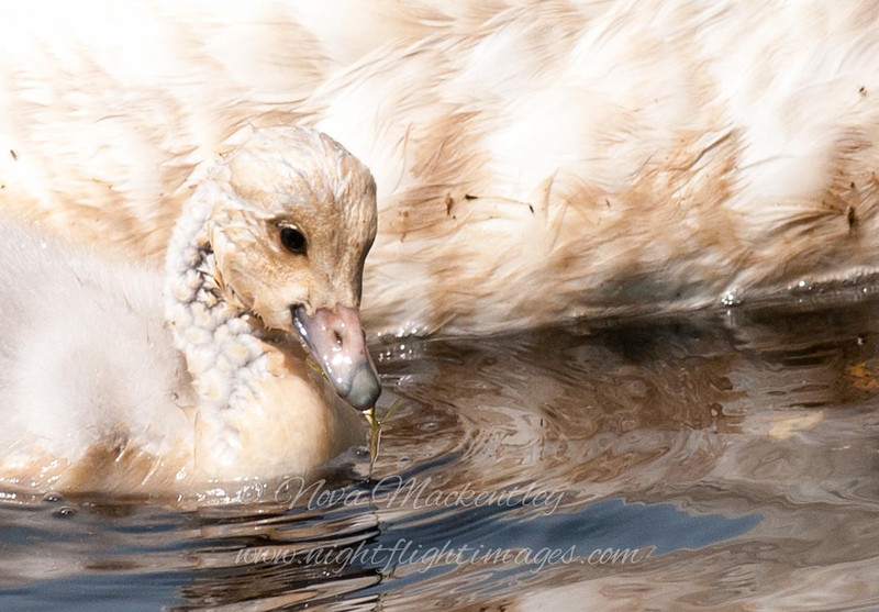 """Trumpeter Swan chick © 2012 Nova Mackentley Whitefish Point, MI TSC  <div class=""""ss-paypal-button""""><div class=""""ss-paypal-add-to-cart-section""""><div class=""""ss-paypal-product-options""""><h4>Mat Sizes</h4><ul><li><a href=""""https://www.paypal.com/cgi-bin/webscr?cmd=_cart&business=T77V5VKCW4K2U&lc=US&item_name=Trumpeter%20Swan%20chick%20%C2%A9%202012%20Nova%20Mackentley%20Whitefish%20Point%2C%20MI%20TSC&item_number=http%3A%2F%2Fwww.nightflightimages.com%2FGalleries-1%2FUpper-Peninsula-of-MI%2Fi-6XQwqVr&button_subtype=products&no_note=0&cn=Add%20special%20instructions%20to%20the%20seller%3A&no_shipping=2&currency_code=USD&weight_unit=lbs&add=1&bn=PP-ShopCartBF%3Abtn_cart_SM.gif%3ANonHosted&on0=Mat%20Sizes&option_select0=5%20x%207&option_amount0=10.00&option_select1=8%20x%2010&option_amount1=18.00&option_select2=11%20x%2014&option_amount2=28.00&option_select3=card&option_amount3=4.00&option_index=0&charset=utf-8&submit=&os0=5%20x%207"""" target=""""paypal""""><span>5 x 7 $11.00 USD</span><img src=""""https://www.paypalobjects.com/en_US/i/btn/btn_cart_SM.gif""""></a></li><li><a href=""""https://www.paypal.com/cgi-bin/webscr?cmd=_cart&business=T77V5VKCW4K2U&lc=US&item_name=Trumpeter%20Swan%20chick%20%C2%A9%202012%20Nova%20Mackentley%20Whitefish%20Point%2C%20MI%20TSC&item_number=http%3A%2F%2Fwww.nightflightimages.com%2FGalleries-1%2FUpper-Peninsula-of-MI%2Fi-6XQwqVr&button_subtype=products&no_note=0&cn=Add%20special%20instructions%20to%20the%20seller%3A&no_shipping=2&currency_code=USD&weight_unit=lbs&add=1&bn=PP-ShopCartBF%3Abtn_cart_SM.gif%3ANonHosted&on0=Mat%20Sizes&option_select0=5%20x%207&option_amount0=10.00&option_select1=8%20x%2010&option_amount1=18.00&option_select2=11%20x%2014&option_amount2=28.00&option_select3=card&option_amount3=4.00&option_index=0&charset=utf-8&submit=&os0=8%20x%2010"""" target=""""paypal""""><span>8 x 10 $19.00 USD</span><img src=""""https://www.paypalobjects.com/en_US/i/btn/btn_cart_SM.gif""""></a></li><li><a href=""""https://www.paypal.com/cgi-bin/webscr?cmd=_cart&business=T77V5VKCW"""