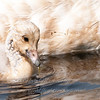 "Trumpeter Swan chick © 2012 Nova Mackentley Whitefish Point, MI TSC  <div class=""ss-paypal-button""><div class=""ss-paypal-add-to-cart-section""><div class=""ss-paypal-product-options""><h4>Mat Sizes</h4><ul><li><a href=""https://www.paypal.com/cgi-bin/webscr?cmd=_cart&business=T77V5VKCW4K2U&lc=US&item_name=Trumpeter%20Swan%20chick%20%C2%A9%202012%20Nova%20Mackentley%20Whitefish%20Point%2C%20MI%20TSC&item_number=http%3A%2F%2Fwww.nightflightimages.com%2FGalleries-1%2FUpper-Peninsula-of-MI%2Fi-6XQwqVr&button_subtype=products&no_note=0&cn=Add%20special%20instructions%20to%20the%20seller%3A&no_shipping=2&currency_code=USD&weight_unit=lbs&add=1&bn=PP-ShopCartBF%3Abtn_cart_SM.gif%3ANonHosted&on0=Mat%20Sizes&option_select0=5%20x%207&option_amount0=10.00&option_select1=8%20x%2010&option_amount1=18.00&option_select2=11%20x%2014&option_amount2=28.00&option_select3=card&option_amount3=4.00&option_index=0&charset=utf-8&submit=&os0=5%20x%207"" target=""paypal""><span>5 x 7 $11.00 USD</span><img src=""https://www.paypalobjects.com/en_US/i/btn/btn_cart_SM.gif""></a></li><li><a href=""https://www.paypal.com/cgi-bin/webscr?cmd=_cart&business=T77V5VKCW4K2U&lc=US&item_name=Trumpeter%20Swan%20chick%20%C2%A9%202012%20Nova%20Mackentley%20Whitefish%20Point%2C%20MI%20TSC&item_number=http%3A%2F%2Fwww.nightflightimages.com%2FGalleries-1%2FUpper-Peninsula-of-MI%2Fi-6XQwqVr&button_subtype=products&no_note=0&cn=Add%20special%20instructions%20to%20the%20seller%3A&no_shipping=2&currency_code=USD&weight_unit=lbs&add=1&bn=PP-ShopCartBF%3Abtn_cart_SM.gif%3ANonHosted&on0=Mat%20Sizes&option_select0=5%20x%207&option_amount0=10.00&option_select1=8%20x%2010&option_amount1=18.00&option_select2=11%20x%2014&option_amount2=28.00&option_select3=card&option_amount3=4.00&option_index=0&charset=utf-8&submit=&os0=8%20x%2010"" target=""paypal""><span>8 x 10 $19.00 USD</span><img src=""https://www.paypalobjects.com/en_US/i/btn/btn_cart_SM.gif""></a></li><li><a href=""https://www.paypal.com/cgi-bin/webscr?cmd=_cart&business=T77V5VKCW4K2U&lc=US&item_name=Trumpeter%20Swan%20chick%20%C2%A9%202012%20Nova%20Mackentley%20Whitefish%20Point%2C%20MI%20TSC&item_number=http%3A%2F%2Fwww.nightflightimages.com%2FGalleries-1%2FUpper-Peninsula-of-MI%2Fi-6XQwqVr&button_subtype=products&no_note=0&cn=Add%20special%20instructions%20to%20the%20seller%3A&no_shipping=2&currency_code=USD&weight_unit=lbs&add=1&bn=PP-ShopCartBF%3Abtn_cart_SM.gif%3ANonHosted&on0=Mat%20Sizes&option_select0=5%20x%207&option_amount0=10.00&option_select1=8%20x%2010&option_amount1=18.00&option_select2=11%20x%2014&option_amount2=28.00&option_select3=card&option_amount3=4.00&option_index=0&charset=utf-8&submit=&os0=11%20x%2014"" target=""paypal""><span>11 x 14 $29.00 USD</span><img src=""https://www.paypalobjects.com/en_US/i/btn/btn_cart_SM.gif""></a></li><li><a href=""https://www.paypal.com/cgi-bin/webscr?cmd=_cart&business=T77V5VKCW4K2U&lc=US&item_name=Trumpeter%20Swan%20chick%20%C2%A9%202012%20Nova%20Mackentley%20Whitefish%20Point%2C%20MI%20TSC&item_number=http%3A%2F%2Fwww.nightflightimages.com%2FGalleries-1%2FUpper-Peninsula-of-MI%2Fi-6XQwqVr&button_subtype=products&no_note=0&cn=Add%20special%20instructions%20to%20the%20seller%3A&no_shipping=2&currency_code=USD&weight_unit=lbs&add=1&bn=PP-ShopCartBF%3Abtn_cart_SM.gif%3ANonHosted&on0=Mat%20Sizes&option_select0=5%20x%207&option_amount0=10.00&option_select1=8%20x%2010&option_amount1=18.00&option_select2=11%20x%2014&option_amount2=28.00&option_select3=card&option_amount3=4.00&option_index=0&charset=utf-8&submit=&os0=card"" target=""paypal""><span>card $5.00 USD</span><img src=""https://www.paypalobjects.com/en_US/i/btn/btn_cart_SM.gif""></a></li></ul></div></div> <div class=""ss-paypal-view-cart-section""><a href=""https://www.paypal.com/cgi-bin/webscr?cmd=_cart&business=T77V5VKCW4K2U&display=1&item_name=Trumpeter%20Swan%20chick%20%C2%A9%202012%20Nova%20Mackentley%20Whitefish%20Point%2C%20MI%20TSC&item_number=http%3A%2F%2Fwww.nightflightimages.com%2FGalleries-1%2FUpper-Peninsula-of-MI%2Fi-6XQwqVr&charset=utf-8&submit="" target=""paypal"" class=""ss-paypal-submit-button""><img src=""https://www.paypalobjects.com/en_US/i/btn/btn_viewcart_LG.gif""></a></div></div><div class=""ss-paypal-button-end""></div>"