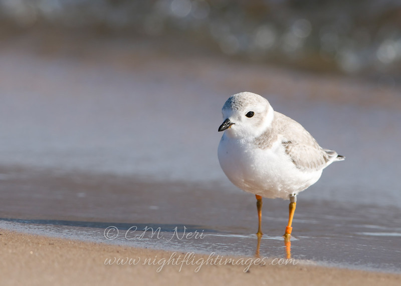 "Piping Plover © 2009 C. M. Neri. Whitefish Point, MI PIPL09  <div class=""ss-paypal-button""><div class=""ss-paypal-add-to-cart-section""><div class=""ss-paypal-product-options""><h4>Mat Sizes</h4><ul><li><a href=""https://www.paypal.com/cgi-bin/webscr?cmd=_cart&business=T77V5VKCW4K2U&lc=US&item_name=Piping%20Plover%20%C2%A9%202009%20C.%20M.%20Neri.%20Whitefish%20Point%2C%20MI%20PIPL09&item_number=http%3A%2F%2Fwww.nightflightimages.com%2FGalleries-1%2FShore%2Fi-7Tks6f6&button_subtype=products&no_note=0&cn=Add%20special%20instructions%20to%20the%20seller%3A&no_shipping=2&currency_code=USD&weight_unit=lbs&add=1&bn=PP-ShopCartBF%3Abtn_cart_SM.gif%3ANonHosted&on0=Mat%20Sizes&option_select0=5%20x%207&option_amount0=10.00&option_select1=8%20x%2010&option_amount1=18.00&option_select2=11%20x%2014&option_amount2=28.00&option_select3=card&option_amount3=4.00&option_index=0&charset=utf-8&submit=&os0=5%20x%207"" target=""paypal""><span>5 x 7 $11.00 USD</span><img src=""https://www.paypalobjects.com/en_US/i/btn/btn_cart_SM.gif""></a></li><li><a href=""https://www.paypal.com/cgi-bin/webscr?cmd=_cart&business=T77V5VKCW4K2U&lc=US&item_name=Piping%20Plover%20%C2%A9%202009%20C.%20M.%20Neri.%20Whitefish%20Point%2C%20MI%20PIPL09&item_number=http%3A%2F%2Fwww.nightflightimages.com%2FGalleries-1%2FShore%2Fi-7Tks6f6&button_subtype=products&no_note=0&cn=Add%20special%20instructions%20to%20the%20seller%3A&no_shipping=2&currency_code=USD&weight_unit=lbs&add=1&bn=PP-ShopCartBF%3Abtn_cart_SM.gif%3ANonHosted&on0=Mat%20Sizes&option_select0=5%20x%207&option_amount0=10.00&option_select1=8%20x%2010&option_amount1=18.00&option_select2=11%20x%2014&option_amount2=28.00&option_select3=card&option_amount3=4.00&option_index=0&charset=utf-8&submit=&os0=8%20x%2010"" target=""paypal""><span>8 x 10 $19.00 USD</span><img src=""https://www.paypalobjects.com/en_US/i/btn/btn_cart_SM.gif""></a></li><li><a href=""https://www.paypal.com/cgi-bin/webscr?cmd=_cart&business=T77V5VKCW4K2U&lc=US&item_name=Piping%20Plover%20%C2%A9%202009%20C.%20M.%20Neri.%20Whitefish%20Point%2C%20MI%20PIPL09&item_number=http%3A%2F%2Fwww.nightflightimages.com%2FGalleries-1%2FShore%2Fi-7Tks6f6&button_subtype=products&no_note=0&cn=Add%20special%20instructions%20to%20the%20seller%3A&no_shipping=2&currency_code=USD&weight_unit=lbs&add=1&bn=PP-ShopCartBF%3Abtn_cart_SM.gif%3ANonHosted&on0=Mat%20Sizes&option_select0=5%20x%207&option_amount0=10.00&option_select1=8%20x%2010&option_amount1=18.00&option_select2=11%20x%2014&option_amount2=28.00&option_select3=card&option_amount3=4.00&option_index=0&charset=utf-8&submit=&os0=11%20x%2014"" target=""paypal""><span>11 x 14 $29.00 USD</span><img src=""https://www.paypalobjects.com/en_US/i/btn/btn_cart_SM.gif""></a></li><li><a href=""https://www.paypal.com/cgi-bin/webscr?cmd=_cart&business=T77V5VKCW4K2U&lc=US&item_name=Piping%20Plover%20%C2%A9%202009%20C.%20M.%20Neri.%20Whitefish%20Point%2C%20MI%20PIPL09&item_number=http%3A%2F%2Fwww.nightflightimages.com%2FGalleries-1%2FShore%2Fi-7Tks6f6&button_subtype=products&no_note=0&cn=Add%20special%20instructions%20to%20the%20seller%3A&no_shipping=2&currency_code=USD&weight_unit=lbs&add=1&bn=PP-ShopCartBF%3Abtn_cart_SM.gif%3ANonHosted&on0=Mat%20Sizes&option_select0=5%20x%207&option_amount0=10.00&option_select1=8%20x%2010&option_amount1=18.00&option_select2=11%20x%2014&option_amount2=28.00&option_select3=card&option_amount3=4.00&option_index=0&charset=utf-8&submit=&os0=card"" target=""paypal""><span>card $5.00 USD</span><img src=""https://www.paypalobjects.com/en_US/i/btn/btn_cart_SM.gif""></a></li></ul></div></div> <div class=""ss-paypal-view-cart-section""><a href=""https://www.paypal.com/cgi-bin/webscr?cmd=_cart&business=T77V5VKCW4K2U&display=1&item_name=Piping%20Plover%20%C2%A9%202009%20C.%20M.%20Neri.%20Whitefish%20Point%2C%20MI%20PIPL09&item_number=http%3A%2F%2Fwww.nightflightimages.com%2FGalleries-1%2FShore%2Fi-7Tks6f6&charset=utf-8&submit="" target=""paypal"" class=""ss-paypal-submit-button""><img src=""https://www.paypalobjects.com/en_US/i/btn/btn_viewcart_LG.gif""></a></div></div><div class=""ss-paypal-button-end""></div>"